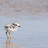 "Piping Plover chick © 2009 C. M. Neri.  Whitefish Point, MI PIPLW  <div class=""ss-paypal-button""><div class=""ss-paypal-add-to-cart-section""><div class=""ss-paypal-product-options""><h4>Mat Sizes</h4><ul><li><a href=""https://www.paypal.com/cgi-bin/webscr?cmd=_cart&business=T77V5VKCW4K2U&lc=US&item_name=Piping%20Plover%20chick%20%C2%A9%202009%20C.%20M.%20Neri.%20%20Whitefish%20Point%2C%20MI%20PIPLW&item_number=http%3A%2F%2Fwww.nightflightimages.com%2FGalleries-1%2FShore%2Fi-BsCTx8q&button_subtype=products&no_note=0&cn=Add%20special%20instructions%20to%20the%20seller%3A&no_shipping=2&currency_code=USD&weight_unit=lbs&add=1&bn=PP-ShopCartBF%3Abtn_cart_SM.gif%3ANonHosted&on0=Mat%20Sizes&option_select0=5%20x%207&option_amount0=10.00&option_select1=8%20x%2010&option_amount1=18.00&option_select2=11%20x%2014&option_amount2=28.00&option_select3=card&option_amount3=4.00&option_index=0&charset=utf-8&submit=&os0=5%20x%207"" target=""paypal""><span>5 x 7 $11.00 USD</span><img src=""https://www.paypalobjects.com/en_US/i/btn/btn_cart_SM.gif""></a></li><li><a href=""https://www.paypal.com/cgi-bin/webscr?cmd=_cart&business=T77V5VKCW4K2U&lc=US&item_name=Piping%20Plover%20chick%20%C2%A9%202009%20C.%20M.%20Neri.%20%20Whitefish%20Point%2C%20MI%20PIPLW&item_number=http%3A%2F%2Fwww.nightflightimages.com%2FGalleries-1%2FShore%2Fi-BsCTx8q&button_subtype=products&no_note=0&cn=Add%20special%20instructions%20to%20the%20seller%3A&no_shipping=2&currency_code=USD&weight_unit=lbs&add=1&bn=PP-ShopCartBF%3Abtn_cart_SM.gif%3ANonHosted&on0=Mat%20Sizes&option_select0=5%20x%207&option_amount0=10.00&option_select1=8%20x%2010&option_amount1=18.00&option_select2=11%20x%2014&option_amount2=28.00&option_select3=card&option_amount3=4.00&option_index=0&charset=utf-8&submit=&os0=8%20x%2010"" target=""paypal""><span>8 x 10 $19.00 USD</span><img src=""https://www.paypalobjects.com/en_US/i/btn/btn_cart_SM.gif""></a></li><li><a href=""https://www.paypal.com/cgi-bin/webscr?cmd=_cart&business=T77V5VKCW4K2U&lc=US&item_name=Piping%20Plover%20chick%20%C2%A9%202009%20C.%20M.%20Neri.%20%20Whitefish%20Point%2C%20MI%20PIPLW&item_number=http%3A%2F%2Fwww.nightflightimages.com%2FGalleries-1%2FShore%2Fi-BsCTx8q&button_subtype=products&no_note=0&cn=Add%20special%20instructions%20to%20the%20seller%3A&no_shipping=2&currency_code=USD&weight_unit=lbs&add=1&bn=PP-ShopCartBF%3Abtn_cart_SM.gif%3ANonHosted&on0=Mat%20Sizes&option_select0=5%20x%207&option_amount0=10.00&option_select1=8%20x%2010&option_amount1=18.00&option_select2=11%20x%2014&option_amount2=28.00&option_select3=card&option_amount3=4.00&option_index=0&charset=utf-8&submit=&os0=11%20x%2014"" target=""paypal""><span>11 x 14 $29.00 USD</span><img src=""https://www.paypalobjects.com/en_US/i/btn/btn_cart_SM.gif""></a></li><li><a href=""https://www.paypal.com/cgi-bin/webscr?cmd=_cart&business=T77V5VKCW4K2U&lc=US&item_name=Piping%20Plover%20chick%20%C2%A9%202009%20C.%20M.%20Neri.%20%20Whitefish%20Point%2C%20MI%20PIPLW&item_number=http%3A%2F%2Fwww.nightflightimages.com%2FGalleries-1%2FShore%2Fi-BsCTx8q&button_subtype=products&no_note=0&cn=Add%20special%20instructions%20to%20the%20seller%3A&no_shipping=2&currency_code=USD&weight_unit=lbs&add=1&bn=PP-ShopCartBF%3Abtn_cart_SM.gif%3ANonHosted&on0=Mat%20Sizes&option_select0=5%20x%207&option_amount0=10.00&option_select1=8%20x%2010&option_amount1=18.00&option_select2=11%20x%2014&option_amount2=28.00&option_select3=card&option_amount3=4.00&option_index=0&charset=utf-8&submit=&os0=card"" target=""paypal""><span>card $5.00 USD</span><img src=""https://www.paypalobjects.com/en_US/i/btn/btn_cart_SM.gif""></a></li></ul></div></div> <div class=""ss-paypal-view-cart-section""><a href=""https://www.paypal.com/cgi-bin/webscr?cmd=_cart&business=T77V5VKCW4K2U&display=1&item_name=Piping%20Plover%20chick%20%C2%A9%202009%20C.%20M.%20Neri.%20%20Whitefish%20Point%2C%20MI%20PIPLW&item_number=http%3A%2F%2Fwww.nightflightimages.com%2FGalleries-1%2FShore%2Fi-BsCTx8q&charset=utf-8&submit="" target=""paypal"" class=""ss-paypal-submit-button""><img src=""https://www.paypalobjects.com/en_US/i/btn/btn_viewcart_LG.gif""></a></div></div><div class=""ss-paypal-button-end""></div>"
