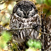 "Boreal Owl © 2008 Chris Neri  Whitefish Point, MI BOOW08  <div class=""ss-paypal-button""><div class=""ss-paypal-add-to-cart-section""><div class=""ss-paypal-product-options""><h4>Mat Sizes</h4><ul><li><a href=""https://www.paypal.com/cgi-bin/webscr?cmd=_cart&amp;business=T77V5VKCW4K2U&amp;lc=US&amp;item_name=Boreal%20Owl%20%C2%A9%202008%20Chris%20Neri%20%20Whitefish%20Point%2C%20MI%20BOOW08&amp;item_number=http%3A%2F%2Fwww.nightflightimages.com%2FGalleries-1%2FUpper-Peninsula-of-MI%2Fi-Cc3Xp98&amp;button_subtype=products&amp;no_note=0&amp;cn=Add%20special%20instructions%20to%20the%20seller%3A&amp;no_shipping=2&amp;currency_code=USD&amp;weight_unit=lbs&amp;add=1&amp;bn=PP-ShopCartBF%3Abtn_cart_SM.gif%3ANonHosted&amp;on0=Mat%20Sizes&amp;option_select0=5%20x%207&amp;option_amount0=10.00&amp;option_select1=8%20x%2010&amp;option_amount1=18.00&amp;option_select2=11%20x%2014&amp;option_amount2=28.00&amp;option_select3=card&amp;option_amount3=4.00&amp;option_index=0&amp;charset=utf-8&amp;submit=&amp;os0=5%20x%207"" target=""paypal""><span>5 x 7 $11.00 USD</span><img src=""https://www.paypalobjects.com/en_US/i/btn/btn_cart_SM.gif""></a></li><li><a href=""https://www.paypal.com/cgi-bin/webscr?cmd=_cart&amp;business=T77V5VKCW4K2U&amp;lc=US&amp;item_name=Boreal%20Owl%20%C2%A9%202008%20Chris%20Neri%20%20Whitefish%20Point%2C%20MI%20BOOW08&amp;item_number=http%3A%2F%2Fwww.nightflightimages.com%2FGalleries-1%2FUpper-Peninsula-of-MI%2Fi-Cc3Xp98&amp;button_subtype=products&amp;no_note=0&amp;cn=Add%20special%20instructions%20to%20the%20seller%3A&amp;no_shipping=2&amp;currency_code=USD&amp;weight_unit=lbs&amp;add=1&amp;bn=PP-ShopCartBF%3Abtn_cart_SM.gif%3ANonHosted&amp;on0=Mat%20Sizes&amp;option_select0=5%20x%207&amp;option_amount0=10.00&amp;option_select1=8%20x%2010&amp;option_amount1=18.00&amp;option_select2=11%20x%2014&amp;option_amount2=28.00&amp;option_select3=card&amp;option_amount3=4.00&amp;option_index=0&amp;charset=utf-8&amp;submit=&amp;os0=8%20x%2010"" target=""paypal""><span>8 x 10 $19.00 USD</span><img src=""https://www.paypalobjects.com/en_US/i/btn/btn_cart_SM.gif""></a></li><li><a href=""https://www.paypal.com/cgi-bin/webscr?cmd=_cart&amp;business=T77V5VKCW4K2U&amp;lc=US&amp;item_name=Boreal%20Owl%20%C2%A9%202008%20Chris%20Neri%20%20Whitefish%20Point%2C%20MI%20BOOW08&amp;item_number=http%3A%2F%2Fwww.nightflightimages.com%2FGalleries-1%2FUpper-Peninsula-of-MI%2Fi-Cc3Xp98&amp;button_subtype=products&amp;no_note=0&amp;cn=Add%20special%20instructions%20to%20the%20seller%3A&amp;no_shipping=2&amp;currency_code=USD&amp;weight_unit=lbs&amp;add=1&amp;bn=PP-ShopCartBF%3Abtn_cart_SM.gif%3ANonHosted&amp;on0=Mat%20Sizes&amp;option_select0=5%20x%207&amp;option_amount0=10.00&amp;option_select1=8%20x%2010&amp;option_amount1=18.00&amp;option_select2=11%20x%2014&amp;option_amount2=28.00&amp;option_select3=card&amp;option_amount3=4.00&amp;option_index=0&amp;charset=utf-8&amp;submit=&amp;os0=11%20x%2014"" target=""paypal""><span>11 x 14 $29.00 USD</span><img src=""https://www.paypalobjects.com/en_US/i/btn/btn_cart_SM.gif""></a></li><li><a href=""https://www.paypal.com/cgi-bin/webscr?cmd=_cart&amp;business=T77V5VKCW4K2U&amp;lc=US&amp;item_name=Boreal%20Owl%20%C2%A9%202008%20Chris%20Neri%20%20Whitefish%20Point%2C%20MI%20BOOW08&amp;item_number=http%3A%2F%2Fwww.nightflightimages.com%2FGalleries-1%2FUpper-Peninsula-of-MI%2Fi-Cc3Xp98&amp;button_subtype=products&amp;no_note=0&amp;cn=Add%20special%20instructions%20to%20the%20seller%3A&amp;no_shipping=2&amp;currency_code=USD&amp;weight_unit=lbs&amp;add=1&amp;bn=PP-ShopCartBF%3Abtn_cart_SM.gif%3ANonHosted&amp;on0=Mat%20Sizes&amp;option_select0=5%20x%207&amp;option_amount0=10.00&amp;option_select1=8%20x%2010&amp;option_amount1=18.00&amp;option_select2=11%20x%2014&amp;option_amount2=28.00&amp;option_select3=card&amp;option_amount3=4.00&amp;option_index=0&amp;charset=utf-8&amp;submit=&amp;os0=card"" target=""paypal""><span>card $5.00 USD</span><img src=""https://www.paypalobjects.com/en_US/i/btn/btn_cart_SM.gif""></a></li></ul></div></div> <div class=""ss-paypal-view-cart-section""><a href=""https://www.paypal.com/cgi-bin/webscr?cmd=_cart&amp;business=T77V5VKCW4K2U&amp;display=1&amp;item_name=Boreal%20Owl%20%C2%A9%202008%20Chris%20Neri%20%20Whitefish%20Point%2C%20MI%20BOOW08&amp;item_number=http%3A%2F%2Fwww.nightflightimages.com%2FGalleries-1%2FUpper-Peninsula-of-MI%2Fi-Cc3Xp98&amp;charset=utf-8&amp;submit="" target=""paypal"" class=""ss-paypal-submit-button""><img src=""https://www.paypalobjects.com/en_US/i/btn/btn_viewcart_LG.gif""></a></div></div><div class=""ss-paypal-button-end""></div>"