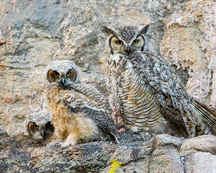 """Great Horned Owl family © 2016 Nova Mackentley Estes Park, CO GH3  <div class=""""ss-paypal-button""""><div class=""""ss-paypal-add-to-cart-section""""><div class=""""ss-paypal-product-options""""><h4>Mat Sizes</h4><ul><li><a href=""""https://www.paypal.com/cgi-bin/webscr?cmd=_cart&amp;business=T77V5VKCW4K2U&amp;lc=US&amp;item_name=Great%20Horned%20Owl%20family%20%C2%A9%202016%20Nova%20Mackentley%20Estes%20Park%2C%20CO%20GH3&amp;item_number=http%3A%2F%2Fwww.nightflightimages.com%2FGalleries-1%2FNew%2Fi-FpqxgMt&amp;button_subtype=products&amp;no_note=0&amp;cn=Add%20special%20instructions%20to%20the%20seller%3A&amp;no_shipping=2&amp;currency_code=USD&amp;weight_unit=lbs&amp;add=1&amp;bn=PP-ShopCartBF%3Abtn_cart_SM.gif%3ANonHosted&amp;on0=Mat%20Sizes&amp;option_select0=5%20x%207&amp;option_amount0=10.00&amp;option_select1=8%20x%2010&amp;option_amount1=18.00&amp;option_select2=11%20x%2014&amp;option_amount2=28.00&amp;option_select3=card&amp;option_amount3=4.00&amp;option_index=0&amp;charset=utf-8&amp;submit=&amp;os0=5%20x%207"""" target=""""paypal""""><span>5 x 7 $11.00 USD</span><img src=""""https://www.paypalobjects.com/en_US/i/btn/btn_cart_SM.gif""""></a></li><li><a href=""""https://www.paypal.com/cgi-bin/webscr?cmd=_cart&amp;business=T77V5VKCW4K2U&amp;lc=US&amp;item_name=Great%20Horned%20Owl%20family%20%C2%A9%202016%20Nova%20Mackentley%20Estes%20Park%2C%20CO%20GH3&amp;item_number=http%3A%2F%2Fwww.nightflightimages.com%2FGalleries-1%2FNew%2Fi-FpqxgMt&amp;button_subtype=products&amp;no_note=0&amp;cn=Add%20special%20instructions%20to%20the%20seller%3A&amp;no_shipping=2&amp;currency_code=USD&amp;weight_unit=lbs&amp;add=1&amp;bn=PP-ShopCartBF%3Abtn_cart_SM.gif%3ANonHosted&amp;on0=Mat%20Sizes&amp;option_select0=5%20x%207&amp;option_amount0=10.00&amp;option_select1=8%20x%2010&amp;option_amount1=18.00&amp;option_select2=11%20x%2014&amp;option_amount2=28.00&amp;option_select3=card&amp;option_amount3=4.00&amp;option_index=0&amp;charset=utf-8&amp;submit=&amp;os0=8%20x%2010"""" target=""""paypal""""><span>8 x 10 $19.00 USD</"""