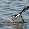 "Black Skimmer © 2010 Nova Mackentley South Padre Island, TX SKG  <div class=""ss-paypal-button""><div class=""ss-paypal-add-to-cart-section""><div class=""ss-paypal-product-options""><h4>Mat Sizes</h4><ul><li><a href=""https://www.paypal.com/cgi-bin/webscr?cmd=_cart&business=T77V5VKCW4K2U&lc=US&item_name=Black%20Skimmer%20%C2%A9%202010%20Nova%20Mackentley%20South%20Padre%20Island%2C%20TX%20SKG&item_number=http%3A%2F%2Fwww.nightflightimages.com%2FGalleries-1%2FOur-Favorites%2Fi-JjSQ5Z6&button_subtype=products&no_note=0&cn=Add%20special%20instructions%20to%20the%20seller%3A&no_shipping=2&currency_code=USD&weight_unit=lbs&add=1&bn=PP-ShopCartBF%3Abtn_cart_SM.gif%3ANonHosted&on0=Mat%20Sizes&option_select0=5%20x%207&option_amount0=10.00&option_select1=8%20x%2010&option_amount1=18.00&option_select2=11%20x%2014&option_amount2=28.00&option_select3=card&option_amount3=4.00&option_index=0&charset=utf-8&submit=&os0=5%20x%207"" target=""paypal""><span>5 x 7 $11.00 USD</span><img src=""https://www.paypalobjects.com/en_US/i/btn/btn_cart_SM.gif""></a></li><li><a href=""https://www.paypal.com/cgi-bin/webscr?cmd=_cart&business=T77V5VKCW4K2U&lc=US&item_name=Black%20Skimmer%20%C2%A9%202010%20Nova%20Mackentley%20South%20Padre%20Island%2C%20TX%20SKG&item_number=http%3A%2F%2Fwww.nightflightimages.com%2FGalleries-1%2FOur-Favorites%2Fi-JjSQ5Z6&button_subtype=products&no_note=0&cn=Add%20special%20instructions%20to%20the%20seller%3A&no_shipping=2&currency_code=USD&weight_unit=lbs&add=1&bn=PP-ShopCartBF%3Abtn_cart_SM.gif%3ANonHosted&on0=Mat%20Sizes&option_select0=5%20x%207&option_amount0=10.00&option_select1=8%20x%2010&option_amount1=18.00&option_select2=11%20x%2014&option_amount2=28.00&option_select3=card&option_amount3=4.00&option_index=0&charset=utf-8&submit=&os0=8%20x%2010"" target=""paypal""><span>8 x 10 $19.00 USD</span><img src=""https://www.paypalobjects.com/en_US/i/btn/btn_cart_SM.gif""></a></li><li><a href=""https://www.paypal.com/cgi-bin/webscr?cmd=_cart&business=T77V5VKCW4K2U&lc=US&item_name=Black%20Skimmer%20%C2%A9%202010%20Nova%20Mackentley%20South%20Padre%20Island%2C%20TX%20SKG&item_number=http%3A%2F%2Fwww.nightflightimages.com%2FGalleries-1%2FOur-Favorites%2Fi-JjSQ5Z6&button_subtype=products&no_note=0&cn=Add%20special%20instructions%20to%20the%20seller%3A&no_shipping=2&currency_code=USD&weight_unit=lbs&add=1&bn=PP-ShopCartBF%3Abtn_cart_SM.gif%3ANonHosted&on0=Mat%20Sizes&option_select0=5%20x%207&option_amount0=10.00&option_select1=8%20x%2010&option_amount1=18.00&option_select2=11%20x%2014&option_amount2=28.00&option_select3=card&option_amount3=4.00&option_index=0&charset=utf-8&submit=&os0=11%20x%2014"" target=""paypal""><span>11 x 14 $29.00 USD</span><img src=""https://www.paypalobjects.com/en_US/i/btn/btn_cart_SM.gif""></a></li><li><a href=""https://www.paypal.com/cgi-bin/webscr?cmd=_cart&business=T77V5VKCW4K2U&lc=US&item_name=Black%20Skimmer%20%C2%A9%202010%20Nova%20Mackentley%20South%20Padre%20Island%2C%20TX%20SKG&item_number=http%3A%2F%2Fwww.nightflightimages.com%2FGalleries-1%2FOur-Favorites%2Fi-JjSQ5Z6&button_subtype=products&no_note=0&cn=Add%20special%20instructions%20to%20the%20seller%3A&no_shipping=2&currency_code=USD&weight_unit=lbs&add=1&bn=PP-ShopCartBF%3Abtn_cart_SM.gif%3ANonHosted&on0=Mat%20Sizes&option_select0=5%20x%207&option_amount0=10.00&option_select1=8%20x%2010&option_amount1=18.00&option_select2=11%20x%2014&option_amount2=28.00&option_select3=card&option_amount3=4.00&option_index=0&charset=utf-8&submit=&os0=card"" target=""paypal""><span>card $5.00 USD</span><img src=""https://www.paypalobjects.com/en_US/i/btn/btn_cart_SM.gif""></a></li></ul></div></div> <div class=""ss-paypal-view-cart-section""><a href=""https://www.paypal.com/cgi-bin/webscr?cmd=_cart&business=T77V5VKCW4K2U&display=1&item_name=Black%20Skimmer%20%C2%A9%202010%20Nova%20Mackentley%20South%20Padre%20Island%2C%20TX%20SKG&item_number=http%3A%2F%2Fwww.nightflightimages.com%2FGalleries-1%2FOur-Favorites%2Fi-JjSQ5Z6&charset=utf-8&submit="" target=""paypal"" class=""ss-paypal-submit-button""><img src=""https://www.paypalobjects.com/en_US/i/btn/btn_viewcart_LG.gif""></a></div></div><div class=""ss-paypal-button-end""></div>"