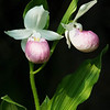 "Showy Lady Slippers © 2008 Nova Mackentley Eastern U.P., MI SLS  <div class=""ss-paypal-button""><div class=""ss-paypal-add-to-cart-section""><div class=""ss-paypal-product-options""><h4>Mat Sizes</h4><ul><li><a href=""https://www.paypal.com/cgi-bin/webscr?cmd=_cart&amp;business=T77V5VKCW4K2U&amp;lc=US&amp;item_name=Showy%20Lady%20Slippers%20%C2%A9%202008%20Nova%20Mackentley%20Eastern%20U.P.%2C%20MI%20SLS&amp;item_number=http%3A%2F%2Fwww.nightflightimages.com%2FGalleries-1%2FUpper-Peninsula-of-MI%2Fi-R5x2xgM&amp;button_subtype=products&amp;no_note=0&amp;cn=Add%20special%20instructions%20to%20the%20seller%3A&amp;no_shipping=2&amp;currency_code=USD&amp;weight_unit=lbs&amp;add=1&amp;bn=PP-ShopCartBF%3Abtn_cart_SM.gif%3ANonHosted&amp;on0=Mat%20Sizes&amp;option_select0=5%20x%207&amp;option_amount0=10.00&amp;option_select1=8%20x%2010&amp;option_amount1=18.00&amp;option_select2=11%20x%2014&amp;option_amount2=28.00&amp;option_select3=card&amp;option_amount3=4.00&amp;option_index=0&amp;charset=utf-8&amp;submit=&amp;os0=5%20x%207"" target=""paypal""><span>5 x 7 $11.00 USD</span><img src=""https://www.paypalobjects.com/en_US/i/btn/btn_cart_SM.gif""></a></li><li><a href=""https://www.paypal.com/cgi-bin/webscr?cmd=_cart&amp;business=T77V5VKCW4K2U&amp;lc=US&amp;item_name=Showy%20Lady%20Slippers%20%C2%A9%202008%20Nova%20Mackentley%20Eastern%20U.P.%2C%20MI%20SLS&amp;item_number=http%3A%2F%2Fwww.nightflightimages.com%2FGalleries-1%2FUpper-Peninsula-of-MI%2Fi-R5x2xgM&amp;button_subtype=products&amp;no_note=0&amp;cn=Add%20special%20instructions%20to%20the%20seller%3A&amp;no_shipping=2&amp;currency_code=USD&amp;weight_unit=lbs&amp;add=1&amp;bn=PP-ShopCartBF%3Abtn_cart_SM.gif%3ANonHosted&amp;on0=Mat%20Sizes&amp;option_select0=5%20x%207&amp;option_amount0=10.00&amp;option_select1=8%20x%2010&amp;option_amount1=18.00&amp;option_select2=11%20x%2014&amp;option_amount2=28.00&amp;option_select3=card&amp;option_amount3=4.00&amp;option_index=0&amp;charset=utf-8&amp;submit=&amp;os0=8%20x%2010"" target=""paypal""><span>8 x 10 $19.00 USD</span><img src=""https://www.paypalobjects.com/en_US/i/btn/btn_cart_SM.gif""></a></li><li><a href=""https://www.paypal.com/cgi-bin/webscr?cmd=_cart&amp;business=T77V5VKCW4K2U&amp;lc=US&amp;item_name=Showy%20Lady%20Slippers%20%C2%A9%202008%20Nova%20Mackentley%20Eastern%20U.P.%2C%20MI%20SLS&amp;item_number=http%3A%2F%2Fwww.nightflightimages.com%2FGalleries-1%2FUpper-Peninsula-of-MI%2Fi-R5x2xgM&amp;button_subtype=products&amp;no_note=0&amp;cn=Add%20special%20instructions%20to%20the%20seller%3A&amp;no_shipping=2&amp;currency_code=USD&amp;weight_unit=lbs&amp;add=1&amp;bn=PP-ShopCartBF%3Abtn_cart_SM.gif%3ANonHosted&amp;on0=Mat%20Sizes&amp;option_select0=5%20x%207&amp;option_amount0=10.00&amp;option_select1=8%20x%2010&amp;option_amount1=18.00&amp;option_select2=11%20x%2014&amp;option_amount2=28.00&amp;option_select3=card&amp;option_amount3=4.00&amp;option_index=0&amp;charset=utf-8&amp;submit=&amp;os0=11%20x%2014"" target=""paypal""><span>11 x 14 $29.00 USD</span><img src=""https://www.paypalobjects.com/en_US/i/btn/btn_cart_SM.gif""></a></li><li><a href=""https://www.paypal.com/cgi-bin/webscr?cmd=_cart&amp;business=T77V5VKCW4K2U&amp;lc=US&amp;item_name=Showy%20Lady%20Slippers%20%C2%A9%202008%20Nova%20Mackentley%20Eastern%20U.P.%2C%20MI%20SLS&amp;item_number=http%3A%2F%2Fwww.nightflightimages.com%2FGalleries-1%2FUpper-Peninsula-of-MI%2Fi-R5x2xgM&amp;button_subtype=products&amp;no_note=0&amp;cn=Add%20special%20instructions%20to%20the%20seller%3A&amp;no_shipping=2&amp;currency_code=USD&amp;weight_unit=lbs&amp;add=1&amp;bn=PP-ShopCartBF%3Abtn_cart_SM.gif%3ANonHosted&amp;on0=Mat%20Sizes&amp;option_select0=5%20x%207&amp;option_amount0=10.00&amp;option_select1=8%20x%2010&amp;option_amount1=18.00&amp;option_select2=11%20x%2014&amp;option_amount2=28.00&amp;option_select3=card&amp;option_amount3=4.00&amp;option_index=0&amp;charset=utf-8&amp;submit=&amp;os0=card"" target=""paypal""><span>card $5.00 USD</span><img src=""https://www.paypalobjects.com/en_US/i/btn/btn_cart_SM.gif""></a></li></ul></div></div> <div class=""ss-paypal-view-cart-section""><a href=""https://www.paypal.com/cgi-bin/webscr?cmd=_cart&amp;business=T77V5VKCW4K2U&amp;display=1&amp;item_name=Showy%20Lady%20Slippers%20%C2%A9%202008%20Nova%20Mackentley%20Eastern%20U.P.%2C%20MI%20SLS&amp;item_number=http%3A%2F%2Fwww.nightflightimages.com%2FGalleries-1%2FUpper-Peninsula-of-MI%2Fi-R5x2xgM&amp;charset=utf-8&amp;submit="" target=""paypal"" class=""ss-paypal-submit-button""><img src=""https://www.paypalobjects.com/en_US/i/btn/btn_viewcart_LG.gif""></a></div></div><div class=""ss-paypal-button-end""></div>"