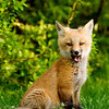 "Red Fox Kit yawning © 2008 Nova Mackentley Whitefish Point, MI FKY  <div class=""ss-paypal-button""><div class=""ss-paypal-add-to-cart-section""><div class=""ss-paypal-product-options""><h4>Mat Sizes</h4><ul><li><a href=""https://www.paypal.com/cgi-bin/webscr?cmd=_cart&business=T77V5VKCW4K2U&lc=US&item_name=Red%20Fox%20Kit%20yawning%20%C2%A9%202008%20Nova%20Mackentley%20Whitefish%20Point%2C%20MI%20FKY&item_number=http%3A%2F%2Fwww.nightflightimages.com%2FGalleries-1%2FMammals%2Fi-bZVQjKp&button_subtype=products&no_note=0&cn=Add%20special%20instructions%20to%20the%20seller%3A&no_shipping=2&currency_code=USD&weight_unit=lbs&add=1&bn=PP-ShopCartBF%3Abtn_cart_SM.gif%3ANonHosted&on0=Mat%20Sizes&option_select0=5%20x%207&option_amount0=10.00&option_select1=8%20x%2010&option_amount1=18.00&option_select2=11%20x%2014&option_amount2=28.00&option_select3=card&option_amount3=4.00&option_index=0&charset=utf-8&submit=&os0=5%20x%207"" target=""paypal""><span>5 x 7 $11.00 USD</span><img src=""https://www.paypalobjects.com/en_US/i/btn/btn_cart_SM.gif""></a></li><li><a href=""https://www.paypal.com/cgi-bin/webscr?cmd=_cart&business=T77V5VKCW4K2U&lc=US&item_name=Red%20Fox%20Kit%20yawning%20%C2%A9%202008%20Nova%20Mackentley%20Whitefish%20Point%2C%20MI%20FKY&item_number=http%3A%2F%2Fwww.nightflightimages.com%2FGalleries-1%2FMammals%2Fi-bZVQjKp&button_subtype=products&no_note=0&cn=Add%20special%20instructions%20to%20the%20seller%3A&no_shipping=2&currency_code=USD&weight_unit=lbs&add=1&bn=PP-ShopCartBF%3Abtn_cart_SM.gif%3ANonHosted&on0=Mat%20Sizes&option_select0=5%20x%207&option_amount0=10.00&option_select1=8%20x%2010&option_amount1=18.00&option_select2=11%20x%2014&option_amount2=28.00&option_select3=card&option_amount3=4.00&option_index=0&charset=utf-8&submit=&os0=8%20x%2010"" target=""paypal""><span>8 x 10 $19.00 USD</span><img src=""https://www.paypalobjects.com/en_US/i/btn/btn_cart_SM.gif""></a></li><li><a href=""https://www.paypal.com/cgi-bin/webscr?cmd=_cart&business=T77V5VKCW4K2U&lc=US&item_name=Red%20Fox%20Kit%20yawning%20%C2%A9%202008%20Nova%20Mackentley%20Whitefish%20Point%2C%20MI%20FKY&item_number=http%3A%2F%2Fwww.nightflightimages.com%2FGalleries-1%2FMammals%2Fi-bZVQjKp&button_subtype=products&no_note=0&cn=Add%20special%20instructions%20to%20the%20seller%3A&no_shipping=2&currency_code=USD&weight_unit=lbs&add=1&bn=PP-ShopCartBF%3Abtn_cart_SM.gif%3ANonHosted&on0=Mat%20Sizes&option_select0=5%20x%207&option_amount0=10.00&option_select1=8%20x%2010&option_amount1=18.00&option_select2=11%20x%2014&option_amount2=28.00&option_select3=card&option_amount3=4.00&option_index=0&charset=utf-8&submit=&os0=11%20x%2014"" target=""paypal""><span>11 x 14 $29.00 USD</span><img src=""https://www.paypalobjects.com/en_US/i/btn/btn_cart_SM.gif""></a></li><li><a href=""https://www.paypal.com/cgi-bin/webscr?cmd=_cart&business=T77V5VKCW4K2U&lc=US&item_name=Red%20Fox%20Kit%20yawning%20%C2%A9%202008%20Nova%20Mackentley%20Whitefish%20Point%2C%20MI%20FKY&item_number=http%3A%2F%2Fwww.nightflightimages.com%2FGalleries-1%2FMammals%2Fi-bZVQjKp&button_subtype=products&no_note=0&cn=Add%20special%20instructions%20to%20the%20seller%3A&no_shipping=2&currency_code=USD&weight_unit=lbs&add=1&bn=PP-ShopCartBF%3Abtn_cart_SM.gif%3ANonHosted&on0=Mat%20Sizes&option_select0=5%20x%207&option_amount0=10.00&option_select1=8%20x%2010&option_amount1=18.00&option_select2=11%20x%2014&option_amount2=28.00&option_select3=card&option_amount3=4.00&option_index=0&charset=utf-8&submit=&os0=card"" target=""paypal""><span>card $5.00 USD</span><img src=""https://www.paypalobjects.com/en_US/i/btn/btn_cart_SM.gif""></a></li></ul></div></div> <div class=""ss-paypal-view-cart-section""><a href=""https://www.paypal.com/cgi-bin/webscr?cmd=_cart&business=T77V5VKCW4K2U&display=1&item_name=Red%20Fox%20Kit%20yawning%20%C2%A9%202008%20Nova%20Mackentley%20Whitefish%20Point%2C%20MI%20FKY&item_number=http%3A%2F%2Fwww.nightflightimages.com%2FGalleries-1%2FMammals%2Fi-bZVQjKp&charset=utf-8&submit="" target=""paypal"" class=""ss-paypal-submit-button""><img src=""https://www.paypalobjects.com/en_US/i/btn/btn_viewcart_LG.gif""></a></div></div><div class=""ss-paypal-button-end""></div>"