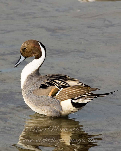 "Northern Pintail © 2007 Nova Mackentley South Padre Island, TX PIN  <div class=""ss-paypal-button""><div class=""ss-paypal-add-to-cart-section""><div class=""ss-paypal-product-options""><h4>Mat Sizes</h4><ul><li><a href=""https://www.paypal.com/cgi-bin/webscr?cmd=_cart&amp;business=T77V5VKCW4K2U&amp;lc=US&amp;item_name=Northern%20Pintail%20%C2%A9%202007%20Nova%20Mackentley%20South%20Padre%20Island%2C%20TX%20PIN&amp;item_number=http%3A%2F%2Fwww.nightflightimages.com%2FGalleries-1%2FOur-Favorites%2Fi-c9Bgk3W&amp;button_subtype=products&amp;no_note=0&amp;cn=Add%20special%20instructions%20to%20the%20seller%3A&amp;no_shipping=2&amp;currency_code=USD&amp;weight_unit=lbs&amp;add=1&amp;bn=PP-ShopCartBF%3Abtn_cart_SM.gif%3ANonHosted&amp;on0=Mat%20Sizes&amp;option_select0=5%20x%207&amp;option_amount0=10.00&amp;option_select1=8%20x%2010&amp;option_amount1=18.00&amp;option_select2=11%20x%2014&amp;option_amount2=28.00&amp;option_select3=card&amp;option_amount3=4.00&amp;option_index=0&amp;charset=utf-8&amp;submit=&amp;os0=5%20x%207"" target=""paypal""><span>5 x 7 $11.00 USD</span><img src=""https://www.paypalobjects.com/en_US/i/btn/btn_cart_SM.gif""></a></li><li><a href=""https://www.paypal.com/cgi-bin/webscr?cmd=_cart&amp;business=T77V5VKCW4K2U&amp;lc=US&amp;item_name=Northern%20Pintail%20%C2%A9%202007%20Nova%20Mackentley%20South%20Padre%20Island%2C%20TX%20PIN&amp;item_number=http%3A%2F%2Fwww.nightflightimages.com%2FGalleries-1%2FOur-Favorites%2Fi-c9Bgk3W&amp;button_subtype=products&amp;no_note=0&amp;cn=Add%20special%20instructions%20to%20the%20seller%3A&amp;no_shipping=2&amp;currency_code=USD&amp;weight_unit=lbs&amp;add=1&amp;bn=PP-ShopCartBF%3Abtn_cart_SM.gif%3ANonHosted&amp;on0=Mat%20Sizes&amp;option_select0=5%20x%207&amp;option_amount0=10.00&amp;option_select1=8%20x%2010&amp;option_amount1=18.00&amp;option_select2=11%20x%2014&amp;option_amount2=28.00&amp;option_select3=card&amp;option_amount3=4.00&amp;option_index=0&amp;charset=utf-8&amp;submit=&amp;os0=8%20x%2010"" target=""paypal""><span>8 x 10 $19.00 USD</span><img src=""https://www.paypalobjects.com/en_US/i/btn/btn_cart_SM.gif""></a></li><li><a href=""https://www.paypal.com/cgi-bin/webscr?cmd=_cart&amp;business=T77V5VKCW4K2U&amp;lc=US&amp;item_name=Northern%20Pintail%20%C2%A9%202007%20Nova%20Mackentley%20South%20Padre%20Island%2C%20TX%20PIN&amp;item_number=http%3A%2F%2Fwww.nightflightimages.com%2FGalleries-1%2FOur-Favorites%2Fi-c9Bgk3W&amp;button_subtype=products&amp;no_note=0&amp;cn=Add%20special%20instructions%20to%20the%20seller%3A&amp;no_shipping=2&amp;currency_code=USD&amp;weight_unit=lbs&amp;add=1&amp;bn=PP-ShopCartBF%3Abtn_cart_SM.gif%3ANonHosted&amp;on0=Mat%20Sizes&amp;option_select0=5%20x%207&amp;option_amount0=10.00&amp;option_select1=8%20x%2010&amp;option_amount1=18.00&amp;option_select2=11%20x%2014&amp;option_amount2=28.00&amp;option_select3=card&amp;option_amount3=4.00&amp;option_index=0&amp;charset=utf-8&amp;submit=&amp;os0=11%20x%2014"" target=""paypal""><span>11 x 14 $29.00 USD</span><img src=""https://www.paypalobjects.com/en_US/i/btn/btn_cart_SM.gif""></a></li><li><a href=""https://www.paypal.com/cgi-bin/webscr?cmd=_cart&amp;business=T77V5VKCW4K2U&amp;lc=US&amp;item_name=Northern%20Pintail%20%C2%A9%202007%20Nova%20Mackentley%20South%20Padre%20Island%2C%20TX%20PIN&amp;item_number=http%3A%2F%2Fwww.nightflightimages.com%2FGalleries-1%2FOur-Favorites%2Fi-c9Bgk3W&amp;button_subtype=products&amp;no_note=0&amp;cn=Add%20special%20instructions%20to%20the%20seller%3A&amp;no_shipping=2&amp;currency_code=USD&amp;weight_unit=lbs&amp;add=1&amp;bn=PP-ShopCartBF%3Abtn_cart_SM.gif%3ANonHosted&amp;on0=Mat%20Sizes&amp;option_select0=5%20x%207&amp;option_amount0=10.00&amp;option_select1=8%20x%2010&amp;option_amount1=18.00&amp;option_select2=11%20x%2014&amp;option_amount2=28.00&amp;option_select3=card&amp;option_amount3=4.00&amp;option_index=0&amp;charset=utf-8&amp;submit=&amp;os0=card"" target=""paypal""><span>card $5.00 USD</span><img src=""https://www.paypalobjects.com/en_US/i/btn/btn_cart_SM.gif""></a></li></ul></div></div> <div class=""ss-paypal-view-cart-section""><a href=""https://www.paypal.com/cgi-bin/webscr?cmd=_cart&amp;business=T77V5VKCW4K2U&amp;display=1&amp;item_name=Northern%20Pintail%20%C2%A9%202007%20Nova%20Mackentley%20South%20Padre%20Island%2C%20TX%20PIN&amp;item_number=http%3A%2F%2Fwww.nightflightimages.com%2FGalleries-1%2FOur-Favorites%2Fi-c9Bgk3W&amp;charset=utf-8&amp;submit="" target=""paypal"" class=""ss-paypal-submit-button""><img src=""https://www.paypalobjects.com/en_US/i/btn/btn_viewcart_LG.gif""></a></div></div><div class=""ss-paypal-button-end""></div>"
