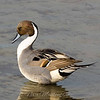 "Northern Pintail © 2007 Nova Mackentley South Padre Island, TX PIN  <div class=""ss-paypal-button""><div class=""ss-paypal-add-to-cart-section""><div class=""ss-paypal-product-options""><h4>Mat Sizes</h4><ul><li><a href=""https://www.paypal.com/cgi-bin/webscr?cmd=_cart&business=T77V5VKCW4K2U&lc=US&item_name=Northern%20Pintail%20%C2%A9%202007%20Nova%20Mackentley%20South%20Padre%20Island%2C%20TX%20PIN&item_number=http%3A%2F%2Fwww.nightflightimages.com%2FGalleries-1%2FOur-Favorites%2Fi-c9Bgk3W&button_subtype=products&no_note=0&cn=Add%20special%20instructions%20to%20the%20seller%3A&no_shipping=2&currency_code=USD&weight_unit=lbs&add=1&bn=PP-ShopCartBF%3Abtn_cart_SM.gif%3ANonHosted&on0=Mat%20Sizes&option_select0=5%20x%207&option_amount0=10.00&option_select1=8%20x%2010&option_amount1=18.00&option_select2=11%20x%2014&option_amount2=28.00&option_select3=card&option_amount3=4.00&option_index=0&charset=utf-8&submit=&os0=5%20x%207"" target=""paypal""><span>5 x 7 $11.00 USD</span><img src=""https://www.paypalobjects.com/en_US/i/btn/btn_cart_SM.gif""></a></li><li><a href=""https://www.paypal.com/cgi-bin/webscr?cmd=_cart&business=T77V5VKCW4K2U&lc=US&item_name=Northern%20Pintail%20%C2%A9%202007%20Nova%20Mackentley%20South%20Padre%20Island%2C%20TX%20PIN&item_number=http%3A%2F%2Fwww.nightflightimages.com%2FGalleries-1%2FOur-Favorites%2Fi-c9Bgk3W&button_subtype=products&no_note=0&cn=Add%20special%20instructions%20to%20the%20seller%3A&no_shipping=2&currency_code=USD&weight_unit=lbs&add=1&bn=PP-ShopCartBF%3Abtn_cart_SM.gif%3ANonHosted&on0=Mat%20Sizes&option_select0=5%20x%207&option_amount0=10.00&option_select1=8%20x%2010&option_amount1=18.00&option_select2=11%20x%2014&option_amount2=28.00&option_select3=card&option_amount3=4.00&option_index=0&charset=utf-8&submit=&os0=8%20x%2010"" target=""paypal""><span>8 x 10 $19.00 USD</span><img src=""https://www.paypalobjects.com/en_US/i/btn/btn_cart_SM.gif""></a></li><li><a href=""https://www.paypal.com/cgi-bin/webscr?cmd=_cart&business=T77V5VKCW4K2U&lc=US&item_name=Northern%20Pintail%20%C2%A9%202007%20Nova%20Mackentley%20South%20Padre%20Island%2C%20TX%20PIN&item_number=http%3A%2F%2Fwww.nightflightimages.com%2FGalleries-1%2FOur-Favorites%2Fi-c9Bgk3W&button_subtype=products&no_note=0&cn=Add%20special%20instructions%20to%20the%20seller%3A&no_shipping=2&currency_code=USD&weight_unit=lbs&add=1&bn=PP-ShopCartBF%3Abtn_cart_SM.gif%3ANonHosted&on0=Mat%20Sizes&option_select0=5%20x%207&option_amount0=10.00&option_select1=8%20x%2010&option_amount1=18.00&option_select2=11%20x%2014&option_amount2=28.00&option_select3=card&option_amount3=4.00&option_index=0&charset=utf-8&submit=&os0=11%20x%2014"" target=""paypal""><span>11 x 14 $29.00 USD</span><img src=""https://www.paypalobjects.com/en_US/i/btn/btn_cart_SM.gif""></a></li><li><a href=""https://www.paypal.com/cgi-bin/webscr?cmd=_cart&business=T77V5VKCW4K2U&lc=US&item_name=Northern%20Pintail%20%C2%A9%202007%20Nova%20Mackentley%20South%20Padre%20Island%2C%20TX%20PIN&item_number=http%3A%2F%2Fwww.nightflightimages.com%2FGalleries-1%2FOur-Favorites%2Fi-c9Bgk3W&button_subtype=products&no_note=0&cn=Add%20special%20instructions%20to%20the%20seller%3A&no_shipping=2&currency_code=USD&weight_unit=lbs&add=1&bn=PP-ShopCartBF%3Abtn_cart_SM.gif%3ANonHosted&on0=Mat%20Sizes&option_select0=5%20x%207&option_amount0=10.00&option_select1=8%20x%2010&option_amount1=18.00&option_select2=11%20x%2014&option_amount2=28.00&option_select3=card&option_amount3=4.00&option_index=0&charset=utf-8&submit=&os0=card"" target=""paypal""><span>card $5.00 USD</span><img src=""https://www.paypalobjects.com/en_US/i/btn/btn_cart_SM.gif""></a></li></ul></div></div> <div class=""ss-paypal-view-cart-section""><a href=""https://www.paypal.com/cgi-bin/webscr?cmd=_cart&business=T77V5VKCW4K2U&display=1&item_name=Northern%20Pintail%20%C2%A9%202007%20Nova%20Mackentley%20South%20Padre%20Island%2C%20TX%20PIN&item_number=http%3A%2F%2Fwww.nightflightimages.com%2FGalleries-1%2FOur-Favorites%2Fi-c9Bgk3W&charset=utf-8&submit="" target=""paypal"" class=""ss-paypal-submit-button""><img src=""https://www.paypalobjects.com/en_US/i/btn/btn_viewcart_LG.gif""></a></div></div><div class=""ss-paypal-button-end""></div>"