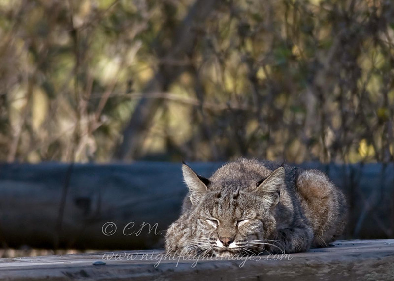 """Bobcat © 2010 C. M. Neri Montana Del Oro, CA BOBCSLP  <div class=""""ss-paypal-button""""><div class=""""ss-paypal-add-to-cart-section""""><div class=""""ss-paypal-product-options""""><h4>Mat Sizes</h4><ul><li><a href=""""https://www.paypal.com/cgi-bin/webscr?cmd=_cart&amp;business=T77V5VKCW4K2U&amp;lc=US&amp;item_name=Bobcat%20%C2%A9%202010%20C.%20M.%20Neri%20Montana%20Del%20Oro%2C%20CA%20BOBCSLP&amp;item_number=http%3A%2F%2Fwww.nightflightimages.com%2FGalleries-1%2FTravels%2Fi-dxqGNnW&amp;button_subtype=products&amp;no_note=0&amp;cn=Add%20special%20instructions%20to%20the%20seller%3A&amp;no_shipping=2&amp;currency_code=USD&amp;weight_unit=lbs&amp;add=1&amp;bn=PP-ShopCartBF%3Abtn_cart_SM.gif%3ANonHosted&amp;on0=Mat%20Sizes&amp;option_select0=5%20x%207&amp;option_amount0=10.00&amp;option_select1=8%20x%2010&amp;option_amount1=18.00&amp;option_select2=11%20x%2014&amp;option_amount2=28.00&amp;option_select3=card&amp;option_amount3=4.00&amp;option_index=0&amp;charset=utf-8&amp;submit=&amp;os0=5%20x%207"""" target=""""paypal""""><span>5 x 7 $11.00 USD</span><img src=""""https://www.paypalobjects.com/en_US/i/btn/btn_cart_SM.gif""""></a></li><li><a href=""""https://www.paypal.com/cgi-bin/webscr?cmd=_cart&amp;business=T77V5VKCW4K2U&amp;lc=US&amp;item_name=Bobcat%20%C2%A9%202010%20C.%20M.%20Neri%20Montana%20Del%20Oro%2C%20CA%20BOBCSLP&amp;item_number=http%3A%2F%2Fwww.nightflightimages.com%2FGalleries-1%2FTravels%2Fi-dxqGNnW&amp;button_subtype=products&amp;no_note=0&amp;cn=Add%20special%20instructions%20to%20the%20seller%3A&amp;no_shipping=2&amp;currency_code=USD&amp;weight_unit=lbs&amp;add=1&amp;bn=PP-ShopCartBF%3Abtn_cart_SM.gif%3ANonHosted&amp;on0=Mat%20Sizes&amp;option_select0=5%20x%207&amp;option_amount0=10.00&amp;option_select1=8%20x%2010&amp;option_amount1=18.00&amp;option_select2=11%20x%2014&amp;option_amount2=28.00&amp;option_select3=card&amp;option_amount3=4.00&amp;option_index=0&amp;charset=utf-8&amp;submit=&amp;os0=8%20x%2010"""" target=""""paypal""""><span>8 x 10 $19.00 USD</span><img src=""""https://www.paypalob"""