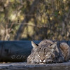 "Bobcat © 2010 C. M. Neri Montana Del Oro, CA BOBCSLP  <div class=""ss-paypal-button""><div class=""ss-paypal-add-to-cart-section""><div class=""ss-paypal-product-options""><h4>Mat Sizes</h4><ul><li><a href=""https://www.paypal.com/cgi-bin/webscr?cmd=_cart&business=T77V5VKCW4K2U&lc=US&item_name=Bobcat%20%C2%A9%202010%20C.%20M.%20Neri%20Montana%20Del%20Oro%2C%20CA%20BOBCSLP&item_number=http%3A%2F%2Fwww.nightflightimages.com%2FGalleries-1%2FTravels%2Fi-dxqGNnW&button_subtype=products&no_note=0&cn=Add%20special%20instructions%20to%20the%20seller%3A&no_shipping=2&currency_code=USD&weight_unit=lbs&add=1&bn=PP-ShopCartBF%3Abtn_cart_SM.gif%3ANonHosted&on0=Mat%20Sizes&option_select0=5%20x%207&option_amount0=10.00&option_select1=8%20x%2010&option_amount1=18.00&option_select2=11%20x%2014&option_amount2=28.00&option_select3=card&option_amount3=4.00&option_index=0&charset=utf-8&submit=&os0=5%20x%207"" target=""paypal""><span>5 x 7 $11.00 USD</span><img src=""https://www.paypalobjects.com/en_US/i/btn/btn_cart_SM.gif""></a></li><li><a href=""https://www.paypal.com/cgi-bin/webscr?cmd=_cart&business=T77V5VKCW4K2U&lc=US&item_name=Bobcat%20%C2%A9%202010%20C.%20M.%20Neri%20Montana%20Del%20Oro%2C%20CA%20BOBCSLP&item_number=http%3A%2F%2Fwww.nightflightimages.com%2FGalleries-1%2FTravels%2Fi-dxqGNnW&button_subtype=products&no_note=0&cn=Add%20special%20instructions%20to%20the%20seller%3A&no_shipping=2&currency_code=USD&weight_unit=lbs&add=1&bn=PP-ShopCartBF%3Abtn_cart_SM.gif%3ANonHosted&on0=Mat%20Sizes&option_select0=5%20x%207&option_amount0=10.00&option_select1=8%20x%2010&option_amount1=18.00&option_select2=11%20x%2014&option_amount2=28.00&option_select3=card&option_amount3=4.00&option_index=0&charset=utf-8&submit=&os0=8%20x%2010"" target=""paypal""><span>8 x 10 $19.00 USD</span><img src=""https://www.paypalobjects.com/en_US/i/btn/btn_cart_SM.gif""></a></li><li><a href=""https://www.paypal.com/cgi-bin/webscr?cmd=_cart&business=T77V5VKCW4K2U&lc=US&item_name=Bobcat%20%C2%A9%202010%20C.%20M.%20Neri%20Montana%20Del%20Oro%2C%20CA%20BOBCSLP&item_number=http%3A%2F%2Fwww.nightflightimages.com%2FGalleries-1%2FTravels%2Fi-dxqGNnW&button_subtype=products&no_note=0&cn=Add%20special%20instructions%20to%20the%20seller%3A&no_shipping=2&currency_code=USD&weight_unit=lbs&add=1&bn=PP-ShopCartBF%3Abtn_cart_SM.gif%3ANonHosted&on0=Mat%20Sizes&option_select0=5%20x%207&option_amount0=10.00&option_select1=8%20x%2010&option_amount1=18.00&option_select2=11%20x%2014&option_amount2=28.00&option_select3=card&option_amount3=4.00&option_index=0&charset=utf-8&submit=&os0=11%20x%2014"" target=""paypal""><span>11 x 14 $29.00 USD</span><img src=""https://www.paypalobjects.com/en_US/i/btn/btn_cart_SM.gif""></a></li><li><a href=""https://www.paypal.com/cgi-bin/webscr?cmd=_cart&business=T77V5VKCW4K2U&lc=US&item_name=Bobcat%20%C2%A9%202010%20C.%20M.%20Neri%20Montana%20Del%20Oro%2C%20CA%20BOBCSLP&item_number=http%3A%2F%2Fwww.nightflightimages.com%2FGalleries-1%2FTravels%2Fi-dxqGNnW&button_subtype=products&no_note=0&cn=Add%20special%20instructions%20to%20the%20seller%3A&no_shipping=2&currency_code=USD&weight_unit=lbs&add=1&bn=PP-ShopCartBF%3Abtn_cart_SM.gif%3ANonHosted&on0=Mat%20Sizes&option_select0=5%20x%207&option_amount0=10.00&option_select1=8%20x%2010&option_amount1=18.00&option_select2=11%20x%2014&option_amount2=28.00&option_select3=card&option_amount3=4.00&option_index=0&charset=utf-8&submit=&os0=card"" target=""paypal""><span>card $5.00 USD</span><img src=""https://www.paypalobjects.com/en_US/i/btn/btn_cart_SM.gif""></a></li></ul></div></div> <div class=""ss-paypal-view-cart-section""><a href=""https://www.paypal.com/cgi-bin/webscr?cmd=_cart&business=T77V5VKCW4K2U&display=1&item_name=Bobcat%20%C2%A9%202010%20C.%20M.%20Neri%20Montana%20Del%20Oro%2C%20CA%20BOBCSLP&item_number=http%3A%2F%2Fwww.nightflightimages.com%2FGalleries-1%2FTravels%2Fi-dxqGNnW&charset=utf-8&submit="" target=""paypal"" class=""ss-paypal-submit-button""><img src=""https://www.paypalobjects.com/en_US/i/btn/btn_viewcart_LG.gif""></a></div></div><div class=""ss-paypal-button-end""></div>"
