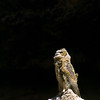 "Great Horned Owl flegling  © 2002 C. M. Neri Snake River Canyon, ID GHOWFLDG  <div class=""ss-paypal-button""><div class=""ss-paypal-add-to-cart-section""><div class=""ss-paypal-product-options""><h4>Mat Sizes</h4><ul><li><a href=""https://www.paypal.com/cgi-bin/webscr?cmd=_cart&business=T77V5VKCW4K2U&lc=US&item_name=Great%20Horned%20Owl%20flegling%20%20%C2%A9%202002%20C.%20M.%20Neri%20Snake%20River%20Canyon%2C%20ID%20GHOWFLDG&item_number=http%3A%2F%2Fwww.nightflightimages.com%2FGalleries-1%2FTravels%2Fi-2gfJmzg&button_subtype=products&no_note=0&cn=Add%20special%20instructions%20to%20the%20seller%3A&no_shipping=2&currency_code=USD&weight_unit=lbs&add=1&bn=PP-ShopCartBF%3Abtn_cart_SM.gif%3ANonHosted&on0=Mat%20Sizes&option_select0=5%20x%207&option_amount0=10.00&option_select1=8%20x%2010&option_amount1=18.00&option_select2=11%20x%2014&option_amount2=28.00&option_select3=card&option_amount3=4.00&option_index=0&charset=utf-8&submit=&os0=5%20x%207"" target=""paypal""><span>5 x 7 $11.00 USD</span><img src=""https://www.paypalobjects.com/en_US/i/btn/btn_cart_SM.gif""></a></li><li><a href=""https://www.paypal.com/cgi-bin/webscr?cmd=_cart&business=T77V5VKCW4K2U&lc=US&item_name=Great%20Horned%20Owl%20flegling%20%20%C2%A9%202002%20C.%20M.%20Neri%20Snake%20River%20Canyon%2C%20ID%20GHOWFLDG&item_number=http%3A%2F%2Fwww.nightflightimages.com%2FGalleries-1%2FTravels%2Fi-2gfJmzg&button_subtype=products&no_note=0&cn=Add%20special%20instructions%20to%20the%20seller%3A&no_shipping=2&currency_code=USD&weight_unit=lbs&add=1&bn=PP-ShopCartBF%3Abtn_cart_SM.gif%3ANonHosted&on0=Mat%20Sizes&option_select0=5%20x%207&option_amount0=10.00&option_select1=8%20x%2010&option_amount1=18.00&option_select2=11%20x%2014&option_amount2=28.00&option_select3=card&option_amount3=4.00&option_index=0&charset=utf-8&submit=&os0=8%20x%2010"" target=""paypal""><span>8 x 10 $19.00 USD</span><img src=""https://www.paypalobjects.com/en_US/i/btn/btn_cart_SM.gif""></a></li><li><a href=""https://www.paypal.com/cgi-bin/webscr?cmd=_cart&business=T77V5VKCW4K2U&lc=US&item_name=Great%20Horned%20Owl%20flegling%20%20%C2%A9%202002%20C.%20M.%20Neri%20Snake%20River%20Canyon%2C%20ID%20GHOWFLDG&item_number=http%3A%2F%2Fwww.nightflightimages.com%2FGalleries-1%2FTravels%2Fi-2gfJmzg&button_subtype=products&no_note=0&cn=Add%20special%20instructions%20to%20the%20seller%3A&no_shipping=2&currency_code=USD&weight_unit=lbs&add=1&bn=PP-ShopCartBF%3Abtn_cart_SM.gif%3ANonHosted&on0=Mat%20Sizes&option_select0=5%20x%207&option_amount0=10.00&option_select1=8%20x%2010&option_amount1=18.00&option_select2=11%20x%2014&option_amount2=28.00&option_select3=card&option_amount3=4.00&option_index=0&charset=utf-8&submit=&os0=11%20x%2014"" target=""paypal""><span>11 x 14 $29.00 USD</span><img src=""https://www.paypalobjects.com/en_US/i/btn/btn_cart_SM.gif""></a></li><li><a href=""https://www.paypal.com/cgi-bin/webscr?cmd=_cart&business=T77V5VKCW4K2U&lc=US&item_name=Great%20Horned%20Owl%20flegling%20%20%C2%A9%202002%20C.%20M.%20Neri%20Snake%20River%20Canyon%2C%20ID%20GHOWFLDG&item_number=http%3A%2F%2Fwww.nightflightimages.com%2FGalleries-1%2FTravels%2Fi-2gfJmzg&button_subtype=products&no_note=0&cn=Add%20special%20instructions%20to%20the%20seller%3A&no_shipping=2&currency_code=USD&weight_unit=lbs&add=1&bn=PP-ShopCartBF%3Abtn_cart_SM.gif%3ANonHosted&on0=Mat%20Sizes&option_select0=5%20x%207&option_amount0=10.00&option_select1=8%20x%2010&option_amount1=18.00&option_select2=11%20x%2014&option_amount2=28.00&option_select3=card&option_amount3=4.00&option_index=0&charset=utf-8&submit=&os0=card"" target=""paypal""><span>card $5.00 USD</span><img src=""https://www.paypalobjects.com/en_US/i/btn/btn_cart_SM.gif""></a></li></ul></div></div> <div class=""ss-paypal-view-cart-section""><a href=""https://www.paypal.com/cgi-bin/webscr?cmd=_cart&business=T77V5VKCW4K2U&display=1&item_name=Great%20Horned%20Owl%20flegling%20%20%C2%A9%202002%20C.%20M.%20Neri%20Snake%20River%20Canyon%2C%20ID%20GHOWFLDG&item_number=http%3A%2F%2Fwww.nightflightimages.com%2FGalleries-1%2FTravels%2Fi-2gfJmzg&charset=utf-8&submit="" target=""paypal"" class=""ss-paypal-submit-button""><img src=""https://www.paypalobjects.com/en_US/i/btn/btn_viewcart_LG.gif""></a></div></div><div class=""ss-paypal-button-end""></div>"
