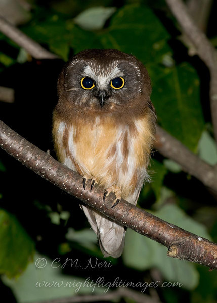 "Northern Saw-whet Owl © 2009 C. M. Neri Whitefish Point, MI NSWOJM09  <div class=""ss-paypal-button""><div class=""ss-paypal-add-to-cart-section""><div class=""ss-paypal-product-options""><h4>Mat Sizes</h4><ul><li><a href=""https://www.paypal.com/cgi-bin/webscr?cmd=_cart&amp;business=T77V5VKCW4K2U&amp;lc=US&amp;item_name=Northern%20Saw-whet%20Owl%20%C2%A9%202009%20C.%20M.%20Neri%20Whitefish%20Point%2C%20MI%20NSWOJM09&amp;item_number=http%3A%2F%2Fwww.nightflightimages.com%2FGalleries-1%2FOwls%2Fi-2mBPMcF&amp;button_subtype=products&amp;no_note=0&amp;cn=Add%20special%20instructions%20to%20the%20seller%3A&amp;no_shipping=2&amp;currency_code=USD&amp;weight_unit=lbs&amp;add=1&amp;bn=PP-ShopCartBF%3Abtn_cart_SM.gif%3ANonHosted&amp;on0=Mat%20Sizes&amp;option_select0=5%20x%207&amp;option_amount0=10.00&amp;option_select1=8%20x%2010&amp;option_amount1=18.00&amp;option_select2=11%20x%2014&amp;option_amount2=28.00&amp;option_select3=card&amp;option_amount3=4.00&amp;option_index=0&amp;charset=utf-8&amp;submit=&amp;os0=5%20x%207"" target=""paypal""><span>5 x 7 $11.00 USD</span><img src=""https://www.paypalobjects.com/en_US/i/btn/btn_cart_SM.gif""></a></li><li><a href=""https://www.paypal.com/cgi-bin/webscr?cmd=_cart&amp;business=T77V5VKCW4K2U&amp;lc=US&amp;item_name=Northern%20Saw-whet%20Owl%20%C2%A9%202009%20C.%20M.%20Neri%20Whitefish%20Point%2C%20MI%20NSWOJM09&amp;item_number=http%3A%2F%2Fwww.nightflightimages.com%2FGalleries-1%2FOwls%2Fi-2mBPMcF&amp;button_subtype=products&amp;no_note=0&amp;cn=Add%20special%20instructions%20to%20the%20seller%3A&amp;no_shipping=2&amp;currency_code=USD&amp;weight_unit=lbs&amp;add=1&amp;bn=PP-ShopCartBF%3Abtn_cart_SM.gif%3ANonHosted&amp;on0=Mat%20Sizes&amp;option_select0=5%20x%207&amp;option_amount0=10.00&amp;option_select1=8%20x%2010&amp;option_amount1=18.00&amp;option_select2=11%20x%2014&amp;option_amount2=28.00&amp;option_select3=card&amp;option_amount3=4.00&amp;option_index=0&amp;charset=utf-8&amp;submit=&amp;os0=8%20x%2010"" target=""paypal""><span>8 x 10 $19.00 USD</span><img src=""https://www.paypalobjects.com/en_US/i/btn/btn_cart_SM.gif""></a></li><li><a href=""https://www.paypal.com/cgi-bin/webscr?cmd=_cart&amp;business=T77V5VKCW4K2U&amp;lc=US&amp;item_name=Northern%20Saw-whet%20Owl%20%C2%A9%202009%20C.%20M.%20Neri%20Whitefish%20Point%2C%20MI%20NSWOJM09&amp;item_number=http%3A%2F%2Fwww.nightflightimages.com%2FGalleries-1%2FOwls%2Fi-2mBPMcF&amp;button_subtype=products&amp;no_note=0&amp;cn=Add%20special%20instructions%20to%20the%20seller%3A&amp;no_shipping=2&amp;currency_code=USD&amp;weight_unit=lbs&amp;add=1&amp;bn=PP-ShopCartBF%3Abtn_cart_SM.gif%3ANonHosted&amp;on0=Mat%20Sizes&amp;option_select0=5%20x%207&amp;option_amount0=10.00&amp;option_select1=8%20x%2010&amp;option_amount1=18.00&amp;option_select2=11%20x%2014&amp;option_amount2=28.00&amp;option_select3=card&amp;option_amount3=4.00&amp;option_index=0&amp;charset=utf-8&amp;submit=&amp;os0=11%20x%2014"" target=""paypal""><span>11 x 14 $29.00 USD</span><img src=""https://www.paypalobjects.com/en_US/i/btn/btn_cart_SM.gif""></a></li><li><a href=""https://www.paypal.com/cgi-bin/webscr?cmd=_cart&amp;business=T77V5VKCW4K2U&amp;lc=US&amp;item_name=Northern%20Saw-whet%20Owl%20%C2%A9%202009%20C.%20M.%20Neri%20Whitefish%20Point%2C%20MI%20NSWOJM09&amp;item_number=http%3A%2F%2Fwww.nightflightimages.com%2FGalleries-1%2FOwls%2Fi-2mBPMcF&amp;button_subtype=products&amp;no_note=0&amp;cn=Add%20special%20instructions%20to%20the%20seller%3A&amp;no_shipping=2&amp;currency_code=USD&amp;weight_unit=lbs&amp;add=1&amp;bn=PP-ShopCartBF%3Abtn_cart_SM.gif%3ANonHosted&amp;on0=Mat%20Sizes&amp;option_select0=5%20x%207&amp;option_amount0=10.00&amp;option_select1=8%20x%2010&amp;option_amount1=18.00&amp;option_select2=11%20x%2014&amp;option_amount2=28.00&amp;option_select3=card&amp;option_amount3=4.00&amp;option_index=0&amp;charset=utf-8&amp;submit=&amp;os0=card"" target=""paypal""><span>card $5.00 USD</span><img src=""https://www.paypalobjects.com/en_US/i/btn/btn_cart_SM.gif""></a></li></ul></div></div> <div class=""ss-paypal-view-cart-section""><a href=""https://www.paypal.com/cgi-bin/webscr?cmd=_cart&amp;business=T77V5VKCW4K2U&amp;display=1&amp;item_name=Northern%20Saw-whet%20Owl%20%C2%A9%202009%20C.%20M.%20Neri%20Whitefish%20Point%2C%20MI%20NSWOJM09&amp;item_number=http%3A%2F%2Fwww.nightflightimages.com%2FGalleries-1%2FOwls%2Fi-2mBPMcF&amp;charset=utf-8&amp;submit="" target=""paypal"" class=""ss-paypal-submit-button""><img src=""https://www.paypalobjects.com/en_US/i/btn/btn_viewcart_LG.gif""></a></div></div><div class=""ss-paypal-button-end""></div>"
