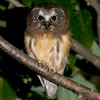 "Northern Saw-whet Owl © 2009 C. M. Neri Whitefish Point, MI NSWOJM09  <div class=""ss-paypal-button""><div class=""ss-paypal-add-to-cart-section""><div class=""ss-paypal-product-options""><h4>Mat Sizes</h4><ul><li><a href=""https://www.paypal.com/cgi-bin/webscr?cmd=_cart&business=T77V5VKCW4K2U&lc=US&item_name=Northern%20Saw-whet%20Owl%20%C2%A9%202009%20C.%20M.%20Neri%20Whitefish%20Point%2C%20MI%20NSWOJM09&item_number=http%3A%2F%2Fwww.nightflightimages.com%2FGalleries-1%2FOwls%2Fi-2mBPMcF&button_subtype=products&no_note=0&cn=Add%20special%20instructions%20to%20the%20seller%3A&no_shipping=2&currency_code=USD&weight_unit=lbs&add=1&bn=PP-ShopCartBF%3Abtn_cart_SM.gif%3ANonHosted&on0=Mat%20Sizes&option_select0=5%20x%207&option_amount0=10.00&option_select1=8%20x%2010&option_amount1=18.00&option_select2=11%20x%2014&option_amount2=28.00&option_select3=card&option_amount3=4.00&option_index=0&charset=utf-8&submit=&os0=5%20x%207"" target=""paypal""><span>5 x 7 $11.00 USD</span><img src=""https://www.paypalobjects.com/en_US/i/btn/btn_cart_SM.gif""></a></li><li><a href=""https://www.paypal.com/cgi-bin/webscr?cmd=_cart&business=T77V5VKCW4K2U&lc=US&item_name=Northern%20Saw-whet%20Owl%20%C2%A9%202009%20C.%20M.%20Neri%20Whitefish%20Point%2C%20MI%20NSWOJM09&item_number=http%3A%2F%2Fwww.nightflightimages.com%2FGalleries-1%2FOwls%2Fi-2mBPMcF&button_subtype=products&no_note=0&cn=Add%20special%20instructions%20to%20the%20seller%3A&no_shipping=2&currency_code=USD&weight_unit=lbs&add=1&bn=PP-ShopCartBF%3Abtn_cart_SM.gif%3ANonHosted&on0=Mat%20Sizes&option_select0=5%20x%207&option_amount0=10.00&option_select1=8%20x%2010&option_amount1=18.00&option_select2=11%20x%2014&option_amount2=28.00&option_select3=card&option_amount3=4.00&option_index=0&charset=utf-8&submit=&os0=8%20x%2010"" target=""paypal""><span>8 x 10 $19.00 USD</span><img src=""https://www.paypalobjects.com/en_US/i/btn/btn_cart_SM.gif""></a></li><li><a href=""https://www.paypal.com/cgi-bin/webscr?cmd=_cart&business=T77V5VKCW4K2U&lc=US&item_name=Northern%20Saw-whet%20Owl%20%C2%A9%202009%20C.%20M.%20Neri%20Whitefish%20Point%2C%20MI%20NSWOJM09&item_number=http%3A%2F%2Fwww.nightflightimages.com%2FGalleries-1%2FOwls%2Fi-2mBPMcF&button_subtype=products&no_note=0&cn=Add%20special%20instructions%20to%20the%20seller%3A&no_shipping=2&currency_code=USD&weight_unit=lbs&add=1&bn=PP-ShopCartBF%3Abtn_cart_SM.gif%3ANonHosted&on0=Mat%20Sizes&option_select0=5%20x%207&option_amount0=10.00&option_select1=8%20x%2010&option_amount1=18.00&option_select2=11%20x%2014&option_amount2=28.00&option_select3=card&option_amount3=4.00&option_index=0&charset=utf-8&submit=&os0=11%20x%2014"" target=""paypal""><span>11 x 14 $29.00 USD</span><img src=""https://www.paypalobjects.com/en_US/i/btn/btn_cart_SM.gif""></a></li><li><a href=""https://www.paypal.com/cgi-bin/webscr?cmd=_cart&business=T77V5VKCW4K2U&lc=US&item_name=Northern%20Saw-whet%20Owl%20%C2%A9%202009%20C.%20M.%20Neri%20Whitefish%20Point%2C%20MI%20NSWOJM09&item_number=http%3A%2F%2Fwww.nightflightimages.com%2FGalleries-1%2FOwls%2Fi-2mBPMcF&button_subtype=products&no_note=0&cn=Add%20special%20instructions%20to%20the%20seller%3A&no_shipping=2&currency_code=USD&weight_unit=lbs&add=1&bn=PP-ShopCartBF%3Abtn_cart_SM.gif%3ANonHosted&on0=Mat%20Sizes&option_select0=5%20x%207&option_amount0=10.00&option_select1=8%20x%2010&option_amount1=18.00&option_select2=11%20x%2014&option_amount2=28.00&option_select3=card&option_amount3=4.00&option_index=0&charset=utf-8&submit=&os0=card"" target=""paypal""><span>card $5.00 USD</span><img src=""https://www.paypalobjects.com/en_US/i/btn/btn_cart_SM.gif""></a></li></ul></div></div> <div class=""ss-paypal-view-cart-section""><a href=""https://www.paypal.com/cgi-bin/webscr?cmd=_cart&business=T77V5VKCW4K2U&display=1&item_name=Northern%20Saw-whet%20Owl%20%C2%A9%202009%20C.%20M.%20Neri%20Whitefish%20Point%2C%20MI%20NSWOJM09&item_number=http%3A%2F%2Fwww.nightflightimages.com%2FGalleries-1%2FOwls%2Fi-2mBPMcF&charset=utf-8&submit="" target=""paypal"" class=""ss-paypal-submit-button""><img src=""https://www.paypalobjects.com/en_US/i/btn/btn_viewcart_LG.gif""></a></div></div><div class=""ss-paypal-button-end""></div>"