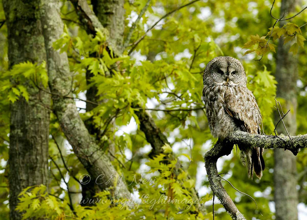 "Great Gray Owl summer © 2006 Chris Neri Chippewa County, MI GGOWSUMMER  <div class=""ss-paypal-button""><div class=""ss-paypal-add-to-cart-section""><div class=""ss-paypal-product-options""><h4>Mat Sizes</h4><ul><li><a href=""https://www.paypal.com/cgi-bin/webscr?cmd=_cart&business=T77V5VKCW4K2U&lc=US&item_name=Great%20Gray%20Owl%20summer%20%C2%A9%202006%20Chris%20Neri%20Chippewa%20County%2C%20MI%20GGOWSUMMER&item_number=http%3A%2F%2Fwww.nightflightimages.com%2FGalleries-1%2FUpper-Peninsula-of-MI%2Fi-2wHv82T&button_subtype=products&no_note=0&cn=Add%20special%20instructions%20to%20the%20seller%3A&no_shipping=2&currency_code=USD&weight_unit=lbs&add=1&bn=PP-ShopCartBF%3Abtn_cart_SM.gif%3ANonHosted&on0=Mat%20Sizes&option_select0=5%20x%207&option_amount0=10.00&option_select1=8%20x%2010&option_amount1=18.00&option_select2=11%20x%2014&option_amount2=28.00&option_select3=card&option_amount3=4.00&option_index=0&charset=utf-8&submit=&os0=5%20x%207"" target=""paypal""><span>5 x 7 $11.00 USD</span><img src=""https://www.paypalobjects.com/en_US/i/btn/btn_cart_SM.gif""></a></li><li><a href=""https://www.paypal.com/cgi-bin/webscr?cmd=_cart&business=T77V5VKCW4K2U&lc=US&item_name=Great%20Gray%20Owl%20summer%20%C2%A9%202006%20Chris%20Neri%20Chippewa%20County%2C%20MI%20GGOWSUMMER&item_number=http%3A%2F%2Fwww.nightflightimages.com%2FGalleries-1%2FUpper-Peninsula-of-MI%2Fi-2wHv82T&button_subtype=products&no_note=0&cn=Add%20special%20instructions%20to%20the%20seller%3A&no_shipping=2&currency_code=USD&weight_unit=lbs&add=1&bn=PP-ShopCartBF%3Abtn_cart_SM.gif%3ANonHosted&on0=Mat%20Sizes&option_select0=5%20x%207&option_amount0=10.00&option_select1=8%20x%2010&option_amount1=18.00&option_select2=11%20x%2014&option_amount2=28.00&option_select3=card&option_amount3=4.00&option_index=0&charset=utf-8&submit=&os0=8%20x%2010"" target=""paypal""><span>8 x 10 $19.00 USD</span><img src=""https://www.paypalobjects.com/en_US/i/btn/btn_cart_SM.gif""></a></li><li><a href=""https://www.paypal.com/cgi-bin/webscr?cmd=_cart&business=T77V5VKCW4K2U&lc=US&item_name=Great%20Gray%20Owl%20summer%20%C2%A9%202006%20Chris%20Neri%20Chippewa%20County%2C%20MI%20GGOWSUMMER&item_number=http%3A%2F%2Fwww.nightflightimages.com%2FGalleries-1%2FUpper-Peninsula-of-MI%2Fi-2wHv82T&button_subtype=products&no_note=0&cn=Add%20special%20instructions%20to%20the%20seller%3A&no_shipping=2&currency_code=USD&weight_unit=lbs&add=1&bn=PP-ShopCartBF%3Abtn_cart_SM.gif%3ANonHosted&on0=Mat%20Sizes&option_select0=5%20x%207&option_amount0=10.00&option_select1=8%20x%2010&option_amount1=18.00&option_select2=11%20x%2014&option_amount2=28.00&option_select3=card&option_amount3=4.00&option_index=0&charset=utf-8&submit=&os0=11%20x%2014"" target=""paypal""><span>11 x 14 $29.00 USD</span><img src=""https://www.paypalobjects.com/en_US/i/btn/btn_cart_SM.gif""></a></li><li><a href=""https://www.paypal.com/cgi-bin/webscr?cmd=_cart&business=T77V5VKCW4K2U&lc=US&item_name=Great%20Gray%20Owl%20summer%20%C2%A9%202006%20Chris%20Neri%20Chippewa%20County%2C%20MI%20GGOWSUMMER&item_number=http%3A%2F%2Fwww.nightflightimages.com%2FGalleries-1%2FUpper-Peninsula-of-MI%2Fi-2wHv82T&button_subtype=products&no_note=0&cn=Add%20special%20instructions%20to%20the%20seller%3A&no_shipping=2&currency_code=USD&weight_unit=lbs&add=1&bn=PP-ShopCartBF%3Abtn_cart_SM.gif%3ANonHosted&on0=Mat%20Sizes&option_select0=5%20x%207&option_amount0=10.00&option_select1=8%20x%2010&option_amount1=18.00&option_select2=11%20x%2014&option_amount2=28.00&option_select3=card&option_amount3=4.00&option_index=0&charset=utf-8&submit=&os0=card"" target=""paypal""><span>card $5.00 USD</span><img src=""https://www.paypalobjects.com/en_US/i/btn/btn_cart_SM.gif""></a></li></ul></div></div> <div class=""ss-paypal-view-cart-section""><a href=""https://www.paypal.com/cgi-bin/webscr?cmd=_cart&business=T77V5VKCW4K2U&display=1&item_name=Great%20Gray%20Owl%20summer%20%C2%A9%202006%20Chris%20Neri%20Chippewa%20County%2C%20MI%20GGOWSUMMER&item_number=http%3A%2F%2Fwww.nightflightimages.com%2FGalleries-1%2FUpper-Peninsula-of-MI%2Fi-2wHv82T&charset=utf-8&submit="" target=""paypal"" class=""ss-paypal-submit-button""><img src=""https://www.paypalobjects.com/en_US/i/btn/btn_viewcart_LG.gif""></a></div></div><div class=""ss-paypal-button-end""></div>"