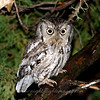 "Eastern Screech Owl © 2008 C. M. Neri Theodore Roosevelt National Park, ND EASO  <div class=""ss-paypal-button""><div class=""ss-paypal-add-to-cart-section""><div class=""ss-paypal-product-options""><h4>Mat Sizes</h4><ul><li><a href=""https://www.paypal.com/cgi-bin/webscr?cmd=_cart&amp;business=T77V5VKCW4K2U&amp;lc=US&amp;item_name=Eastern%20Screech%20Owl%20%C2%A9%202008%20C.%20M.%20Neri%20Theodore%20Roosevelt%20National%20Park%2C%20ND%20EASO&amp;item_number=http%3A%2F%2Fwww.nightflightimages.com%2FGalleries-1%2FTravels%2Fi-3CTLjqn&amp;button_subtype=products&amp;no_note=0&amp;cn=Add%20special%20instructions%20to%20the%20seller%3A&amp;no_shipping=2&amp;currency_code=USD&amp;weight_unit=lbs&amp;add=1&amp;bn=PP-ShopCartBF%3Abtn_cart_SM.gif%3ANonHosted&amp;on0=Mat%20Sizes&amp;option_select0=5%20x%207&amp;option_amount0=10.00&amp;option_select1=8%20x%2010&amp;option_amount1=18.00&amp;option_select2=11%20x%2014&amp;option_amount2=28.00&amp;option_select3=card&amp;option_amount3=4.00&amp;option_index=0&amp;charset=utf-8&amp;submit=&amp;os0=5%20x%207"" target=""paypal""><span>5 x 7 $11.00 USD</span><img src=""https://www.paypalobjects.com/en_US/i/btn/btn_cart_SM.gif""></a></li><li><a href=""https://www.paypal.com/cgi-bin/webscr?cmd=_cart&amp;business=T77V5VKCW4K2U&amp;lc=US&amp;item_name=Eastern%20Screech%20Owl%20%C2%A9%202008%20C.%20M.%20Neri%20Theodore%20Roosevelt%20National%20Park%2C%20ND%20EASO&amp;item_number=http%3A%2F%2Fwww.nightflightimages.com%2FGalleries-1%2FTravels%2Fi-3CTLjqn&amp;button_subtype=products&amp;no_note=0&amp;cn=Add%20special%20instructions%20to%20the%20seller%3A&amp;no_shipping=2&amp;currency_code=USD&amp;weight_unit=lbs&amp;add=1&amp;bn=PP-ShopCartBF%3Abtn_cart_SM.gif%3ANonHosted&amp;on0=Mat%20Sizes&amp;option_select0=5%20x%207&amp;option_amount0=10.00&amp;option_select1=8%20x%2010&amp;option_amount1=18.00&amp;option_select2=11%20x%2014&amp;option_amount2=28.00&amp;option_select3=card&amp;option_amount3=4.00&amp;option_index=0&amp;charset=utf-8&amp;submit=&amp;os0=8%20x%2010"" target=""paypal""><span>8 x 10 $19.00 USD</span><img src=""https://www.paypalobjects.com/en_US/i/btn/btn_cart_SM.gif""></a></li><li><a href=""https://www.paypal.com/cgi-bin/webscr?cmd=_cart&amp;business=T77V5VKCW4K2U&amp;lc=US&amp;item_name=Eastern%20Screech%20Owl%20%C2%A9%202008%20C.%20M.%20Neri%20Theodore%20Roosevelt%20National%20Park%2C%20ND%20EASO&amp;item_number=http%3A%2F%2Fwww.nightflightimages.com%2FGalleries-1%2FTravels%2Fi-3CTLjqn&amp;button_subtype=products&amp;no_note=0&amp;cn=Add%20special%20instructions%20to%20the%20seller%3A&amp;no_shipping=2&amp;currency_code=USD&amp;weight_unit=lbs&amp;add=1&amp;bn=PP-ShopCartBF%3Abtn_cart_SM.gif%3ANonHosted&amp;on0=Mat%20Sizes&amp;option_select0=5%20x%207&amp;option_amount0=10.00&amp;option_select1=8%20x%2010&amp;option_amount1=18.00&amp;option_select2=11%20x%2014&amp;option_amount2=28.00&amp;option_select3=card&amp;option_amount3=4.00&amp;option_index=0&amp;charset=utf-8&amp;submit=&amp;os0=11%20x%2014"" target=""paypal""><span>11 x 14 $29.00 USD</span><img src=""https://www.paypalobjects.com/en_US/i/btn/btn_cart_SM.gif""></a></li><li><a href=""https://www.paypal.com/cgi-bin/webscr?cmd=_cart&amp;business=T77V5VKCW4K2U&amp;lc=US&amp;item_name=Eastern%20Screech%20Owl%20%C2%A9%202008%20C.%20M.%20Neri%20Theodore%20Roosevelt%20National%20Park%2C%20ND%20EASO&amp;item_number=http%3A%2F%2Fwww.nightflightimages.com%2FGalleries-1%2FTravels%2Fi-3CTLjqn&amp;button_subtype=products&amp;no_note=0&amp;cn=Add%20special%20instructions%20to%20the%20seller%3A&amp;no_shipping=2&amp;currency_code=USD&amp;weight_unit=lbs&amp;add=1&amp;bn=PP-ShopCartBF%3Abtn_cart_SM.gif%3ANonHosted&amp;on0=Mat%20Sizes&amp;option_select0=5%20x%207&amp;option_amount0=10.00&amp;option_select1=8%20x%2010&amp;option_amount1=18.00&amp;option_select2=11%20x%2014&amp;option_amount2=28.00&amp;option_select3=card&amp;option_amount3=4.00&amp;option_index=0&amp;charset=utf-8&amp;submit=&amp;os0=card"" target=""paypal""><span>card $5.00 USD</span><img src=""https://www.paypalobjects.com/en_US/i/btn/btn_cart_SM.gif""></a></li></ul></div></div> <div class=""ss-paypal-view-cart-section""><a href=""https://www.paypal.com/cgi-bin/webscr?cmd=_cart&amp;business=T77V5VKCW4K2U&amp;display=1&amp;item_name=Eastern%20Screech%20Owl%20%C2%A9%202008%20C.%20M.%20Neri%20Theodore%20Roosevelt%20National%20Park%2C%20ND%20EASO&amp;item_number=http%3A%2F%2Fwww.nightflightimages.com%2FGalleries-1%2FTravels%2Fi-3CTLjqn&amp;charset=utf-8&amp;submit="" target=""paypal"" class=""ss-paypal-submit-button""><img src=""https://www.paypalobjects.com/en_US/i/btn/btn_viewcart_LG.gif""></a></div></div><div class=""ss-paypal-button-end""></div>"