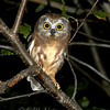 "Northern Saw-whet Owl © 2006 C. M. Neri  Whitefish Point, MI  NSWOJM06  <div class=""ss-paypal-button""><div class=""ss-paypal-add-to-cart-section""><div class=""ss-paypal-product-options""><h4>Mat Sizes</h4><ul><li><a href=""https://www.paypal.com/cgi-bin/webscr?cmd=_cart&business=T77V5VKCW4K2U&lc=US&item_name=Northern%20Saw-whet%20Owl%20%C2%A9%202006%20C.%20M.%20Neri%20%20Whitefish%20Point%2C%20MI%20%20NSWOJM06&item_number=http%3A%2F%2Fwww.nightflightimages.com%2FGalleries-1%2FOwls%2Fi-44kjVWW&button_subtype=products&no_note=0&cn=Add%20special%20instructions%20to%20the%20seller%3A&no_shipping=2&currency_code=USD&weight_unit=lbs&add=1&bn=PP-ShopCartBF%3Abtn_cart_SM.gif%3ANonHosted&on0=Mat%20Sizes&option_select0=5%20x%207&option_amount0=10.00&option_select1=8%20x%2010&option_amount1=18.00&option_select2=11%20x%2014&option_amount2=28.00&option_select3=card&option_amount3=4.00&option_index=0&charset=utf-8&submit=&os0=5%20x%207"" target=""paypal""><span>5 x 7 $11.00 USD</span><img src=""https://www.paypalobjects.com/en_US/i/btn/btn_cart_SM.gif""></a></li><li><a href=""https://www.paypal.com/cgi-bin/webscr?cmd=_cart&business=T77V5VKCW4K2U&lc=US&item_name=Northern%20Saw-whet%20Owl%20%C2%A9%202006%20C.%20M.%20Neri%20%20Whitefish%20Point%2C%20MI%20%20NSWOJM06&item_number=http%3A%2F%2Fwww.nightflightimages.com%2FGalleries-1%2FOwls%2Fi-44kjVWW&button_subtype=products&no_note=0&cn=Add%20special%20instructions%20to%20the%20seller%3A&no_shipping=2&currency_code=USD&weight_unit=lbs&add=1&bn=PP-ShopCartBF%3Abtn_cart_SM.gif%3ANonHosted&on0=Mat%20Sizes&option_select0=5%20x%207&option_amount0=10.00&option_select1=8%20x%2010&option_amount1=18.00&option_select2=11%20x%2014&option_amount2=28.00&option_select3=card&option_amount3=4.00&option_index=0&charset=utf-8&submit=&os0=8%20x%2010"" target=""paypal""><span>8 x 10 $19.00 USD</span><img src=""https://www.paypalobjects.com/en_US/i/btn/btn_cart_SM.gif""></a></li><li><a href=""https://www.paypal.com/cgi-bin/webscr?cmd=_cart&business=T77V5VKCW4K2U&lc=US&item_name=Northern%20Saw-whet%20Owl%20%C2%A9%202006%20C.%20M.%20Neri%20%20Whitefish%20Point%2C%20MI%20%20NSWOJM06&item_number=http%3A%2F%2Fwww.nightflightimages.com%2FGalleries-1%2FOwls%2Fi-44kjVWW&button_subtype=products&no_note=0&cn=Add%20special%20instructions%20to%20the%20seller%3A&no_shipping=2&currency_code=USD&weight_unit=lbs&add=1&bn=PP-ShopCartBF%3Abtn_cart_SM.gif%3ANonHosted&on0=Mat%20Sizes&option_select0=5%20x%207&option_amount0=10.00&option_select1=8%20x%2010&option_amount1=18.00&option_select2=11%20x%2014&option_amount2=28.00&option_select3=card&option_amount3=4.00&option_index=0&charset=utf-8&submit=&os0=11%20x%2014"" target=""paypal""><span>11 x 14 $29.00 USD</span><img src=""https://www.paypalobjects.com/en_US/i/btn/btn_cart_SM.gif""></a></li><li><a href=""https://www.paypal.com/cgi-bin/webscr?cmd=_cart&business=T77V5VKCW4K2U&lc=US&item_name=Northern%20Saw-whet%20Owl%20%C2%A9%202006%20C.%20M.%20Neri%20%20Whitefish%20Point%2C%20MI%20%20NSWOJM06&item_number=http%3A%2F%2Fwww.nightflightimages.com%2FGalleries-1%2FOwls%2Fi-44kjVWW&button_subtype=products&no_note=0&cn=Add%20special%20instructions%20to%20the%20seller%3A&no_shipping=2&currency_code=USD&weight_unit=lbs&add=1&bn=PP-ShopCartBF%3Abtn_cart_SM.gif%3ANonHosted&on0=Mat%20Sizes&option_select0=5%20x%207&option_amount0=10.00&option_select1=8%20x%2010&option_amount1=18.00&option_select2=11%20x%2014&option_amount2=28.00&option_select3=card&option_amount3=4.00&option_index=0&charset=utf-8&submit=&os0=card"" target=""paypal""><span>card $5.00 USD</span><img src=""https://www.paypalobjects.com/en_US/i/btn/btn_cart_SM.gif""></a></li></ul></div></div> <div class=""ss-paypal-view-cart-section""><a href=""https://www.paypal.com/cgi-bin/webscr?cmd=_cart&business=T77V5VKCW4K2U&display=1&item_name=Northern%20Saw-whet%20Owl%20%C2%A9%202006%20C.%20M.%20Neri%20%20Whitefish%20Point%2C%20MI%20%20NSWOJM06&item_number=http%3A%2F%2Fwww.nightflightimages.com%2FGalleries-1%2FOwls%2Fi-44kjVWW&charset=utf-8&submit="" target=""paypal"" class=""ss-paypal-submit-button""><img src=""https://www.paypalobjects.com/en_US/i/btn/btn_viewcart_LG.gif""></a></div></div><div class=""ss-paypal-button-end""></div>"