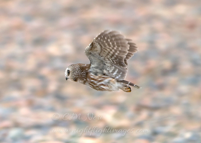 "Northern Saw=whet Owl  © 2010 C. M. Neri Whitefish Point, MI NSWOFLGT  <div class=""ss-paypal-button""><div class=""ss-paypal-add-to-cart-section""><div class=""ss-paypal-product-options""><h4>Mat Sizes</h4><ul><li><a href=""https://www.paypal.com/cgi-bin/webscr?cmd=_cart&amp;business=T77V5VKCW4K2U&amp;lc=US&amp;item_name=Northern%20Saw%3Dwhet%20Owl%20%20%C2%A9%202010%20C.%20M.%20Neri%20Whitefish%20Point%2C%20MI%20NSWOFLGT&amp;item_number=http%3A%2F%2Fwww.nightflightimages.com%2FGalleries-1%2FUpper-Peninsula-of-MI%2Fi-4NhLC6q&amp;button_subtype=products&amp;no_note=0&amp;cn=Add%20special%20instructions%20to%20the%20seller%3A&amp;no_shipping=2&amp;currency_code=USD&amp;weight_unit=lbs&amp;add=1&amp;bn=PP-ShopCartBF%3Abtn_cart_SM.gif%3ANonHosted&amp;on0=Mat%20Sizes&amp;option_select0=5%20x%207&amp;option_amount0=10.00&amp;option_select1=8%20x%2010&amp;option_amount1=18.00&amp;option_select2=11%20x%2014&amp;option_amount2=28.00&amp;option_select3=card&amp;option_amount3=4.00&amp;option_index=0&amp;charset=utf-8&amp;submit=&amp;os0=5%20x%207"" target=""paypal""><span>5 x 7 $11.00 USD</span><img src=""https://www.paypalobjects.com/en_US/i/btn/btn_cart_SM.gif""></a></li><li><a href=""https://www.paypal.com/cgi-bin/webscr?cmd=_cart&amp;business=T77V5VKCW4K2U&amp;lc=US&amp;item_name=Northern%20Saw%3Dwhet%20Owl%20%20%C2%A9%202010%20C.%20M.%20Neri%20Whitefish%20Point%2C%20MI%20NSWOFLGT&amp;item_number=http%3A%2F%2Fwww.nightflightimages.com%2FGalleries-1%2FUpper-Peninsula-of-MI%2Fi-4NhLC6q&amp;button_subtype=products&amp;no_note=0&amp;cn=Add%20special%20instructions%20to%20the%20seller%3A&amp;no_shipping=2&amp;currency_code=USD&amp;weight_unit=lbs&amp;add=1&amp;bn=PP-ShopCartBF%3Abtn_cart_SM.gif%3ANonHosted&amp;on0=Mat%20Sizes&amp;option_select0=5%20x%207&amp;option_amount0=10.00&amp;option_select1=8%20x%2010&amp;option_amount1=18.00&amp;option_select2=11%20x%2014&amp;option_amount2=28.00&amp;option_select3=card&amp;option_amount3=4.00&amp;option_index=0&amp;charset=utf-8&amp;submit=&amp;os0=8%20x%2010"" target=""paypal""><span>8 x 10 $19.00 USD</span><img src=""https://www.paypalobjects.com/en_US/i/btn/btn_cart_SM.gif""></a></li><li><a href=""https://www.paypal.com/cgi-bin/webscr?cmd=_cart&amp;business=T77V5VKCW4K2U&amp;lc=US&amp;item_name=Northern%20Saw%3Dwhet%20Owl%20%20%C2%A9%202010%20C.%20M.%20Neri%20Whitefish%20Point%2C%20MI%20NSWOFLGT&amp;item_number=http%3A%2F%2Fwww.nightflightimages.com%2FGalleries-1%2FUpper-Peninsula-of-MI%2Fi-4NhLC6q&amp;button_subtype=products&amp;no_note=0&amp;cn=Add%20special%20instructions%20to%20the%20seller%3A&amp;no_shipping=2&amp;currency_code=USD&amp;weight_unit=lbs&amp;add=1&amp;bn=PP-ShopCartBF%3Abtn_cart_SM.gif%3ANonHosted&amp;on0=Mat%20Sizes&amp;option_select0=5%20x%207&amp;option_amount0=10.00&amp;option_select1=8%20x%2010&amp;option_amount1=18.00&amp;option_select2=11%20x%2014&amp;option_amount2=28.00&amp;option_select3=card&amp;option_amount3=4.00&amp;option_index=0&amp;charset=utf-8&amp;submit=&amp;os0=11%20x%2014"" target=""paypal""><span>11 x 14 $29.00 USD</span><img src=""https://www.paypalobjects.com/en_US/i/btn/btn_cart_SM.gif""></a></li><li><a href=""https://www.paypal.com/cgi-bin/webscr?cmd=_cart&amp;business=T77V5VKCW4K2U&amp;lc=US&amp;item_name=Northern%20Saw%3Dwhet%20Owl%20%20%C2%A9%202010%20C.%20M.%20Neri%20Whitefish%20Point%2C%20MI%20NSWOFLGT&amp;item_number=http%3A%2F%2Fwww.nightflightimages.com%2FGalleries-1%2FUpper-Peninsula-of-MI%2Fi-4NhLC6q&amp;button_subtype=products&amp;no_note=0&amp;cn=Add%20special%20instructions%20to%20the%20seller%3A&amp;no_shipping=2&amp;currency_code=USD&amp;weight_unit=lbs&amp;add=1&amp;bn=PP-ShopCartBF%3Abtn_cart_SM.gif%3ANonHosted&amp;on0=Mat%20Sizes&amp;option_select0=5%20x%207&amp;option_amount0=10.00&amp;option_select1=8%20x%2010&amp;option_amount1=18.00&amp;option_select2=11%20x%2014&amp;option_amount2=28.00&amp;option_select3=card&amp;option_amount3=4.00&amp;option_index=0&amp;charset=utf-8&amp;submit=&amp;os0=card"" target=""paypal""><span>card $5.00 USD</span><img src=""https://www.paypalobjects.com/en_US/i/btn/btn_cart_SM.gif""></a></li></ul></div></div> <div class=""ss-paypal-view-cart-section""><a href=""https://www.paypal.com/cgi-bin/webscr?cmd=_cart&amp;business=T77V5VKCW4K2U&amp;display=1&amp;item_name=Northern%20Saw%3Dwhet%20Owl%20%20%C2%A9%202010%20C.%20M.%20Neri%20Whitefish%20Point%2C%20MI%20NSWOFLGT&amp;item_number=http%3A%2F%2Fwww.nightflightimages.com%2FGalleries-1%2FUpper-Peninsula-of-MI%2Fi-4NhLC6q&amp;charset=utf-8&amp;submit="" target=""paypal"" class=""ss-paypal-submit-button""><img src=""https://www.paypalobjects.com/en_US/i/btn/btn_viewcart_LG.gif""></a></div></div><div class=""ss-paypal-button-end""></div>"