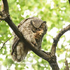 "Great Horned Owl preening © 2007 Nova Mackentley Cedarville, MI GHP *Published in Northern Woodlands magazine Summer 2007  <div class=""ss-paypal-button""><div class=""ss-paypal-add-to-cart-section""><div class=""ss-paypal-product-options""><h4>Mat Sizes</h4><ul><li><a href=""https://www.paypal.com/cgi-bin/webscr?cmd=_cart&amp;business=T77V5VKCW4K2U&amp;lc=US&amp;item_name=Great%20Horned%20Owl%20preening%20%C2%A9%202007%20Nova%20Mackentley%20Cedarville%2C%20MI%20GHP%20*Published%20in%20Northern%20Woodlands%20magazine%20Summer%202007&amp;item_number=http%3A%2F%2Fwww.nightflightimages.com%2FGalleries-1%2FUpper-Peninsula-of-MI%2Fi-5v59Pw2&amp;button_subtype=products&amp;no_note=0&amp;cn=Add%20special%20instructions%20to%20the%20seller%3A&amp;no_shipping=2&amp;currency_code=USD&amp;weight_unit=lbs&amp;add=1&amp;bn=PP-ShopCartBF%3Abtn_cart_SM.gif%3ANonHosted&amp;on0=Mat%20Sizes&amp;option_select0=5%20x%207&amp;option_amount0=10.00&amp;option_select1=8%20x%2010&amp;option_amount1=18.00&amp;option_select2=11%20x%2014&amp;option_amount2=28.00&amp;option_select3=card&amp;option_amount3=4.00&amp;option_index=0&amp;charset=utf-8&amp;submit=&amp;os0=5%20x%207"" target=""paypal""><span>5 x 7 $11.00 USD</span><img src=""https://www.paypalobjects.com/en_US/i/btn/btn_cart_SM.gif""></a></li><li><a href=""https://www.paypal.com/cgi-bin/webscr?cmd=_cart&amp;business=T77V5VKCW4K2U&amp;lc=US&amp;item_name=Great%20Horned%20Owl%20preening%20%C2%A9%202007%20Nova%20Mackentley%20Cedarville%2C%20MI%20GHP%20*Published%20in%20Northern%20Woodlands%20magazine%20Summer%202007&amp;item_number=http%3A%2F%2Fwww.nightflightimages.com%2FGalleries-1%2FUpper-Peninsula-of-MI%2Fi-5v59Pw2&amp;button_subtype=products&amp;no_note=0&amp;cn=Add%20special%20instructions%20to%20the%20seller%3A&amp;no_shipping=2&amp;currency_code=USD&amp;weight_unit=lbs&amp;add=1&amp;bn=PP-ShopCartBF%3Abtn_cart_SM.gif%3ANonHosted&amp;on0=Mat%20Sizes&amp;option_select0=5%20x%207&amp;option_amount0=10.00&amp;option_select1=8%20x%2010&amp;option_amount1=18.00&amp;option_select2=11%20x%2014&amp;option_amount2=28.00&amp;option_select3=card&amp;option_amount3=4.00&amp;option_index=0&amp;charset=utf-8&amp;submit=&amp;os0=8%20x%2010"" target=""paypal""><span>8 x 10 $19.00 USD</span><img src=""https://www.paypalobjects.com/en_US/i/btn/btn_cart_SM.gif""></a></li><li><a href=""https://www.paypal.com/cgi-bin/webscr?cmd=_cart&amp;business=T77V5VKCW4K2U&amp;lc=US&amp;item_name=Great%20Horned%20Owl%20preening%20%C2%A9%202007%20Nova%20Mackentley%20Cedarville%2C%20MI%20GHP%20*Published%20in%20Northern%20Woodlands%20magazine%20Summer%202007&amp;item_number=http%3A%2F%2Fwww.nightflightimages.com%2FGalleries-1%2FUpper-Peninsula-of-MI%2Fi-5v59Pw2&amp;button_subtype=products&amp;no_note=0&amp;cn=Add%20special%20instructions%20to%20the%20seller%3A&amp;no_shipping=2&amp;currency_code=USD&amp;weight_unit=lbs&amp;add=1&amp;bn=PP-ShopCartBF%3Abtn_cart_SM.gif%3ANonHosted&amp;on0=Mat%20Sizes&amp;option_select0=5%20x%207&amp;option_amount0=10.00&amp;option_select1=8%20x%2010&amp;option_amount1=18.00&amp;option_select2=11%20x%2014&amp;option_amount2=28.00&amp;option_select3=card&amp;option_amount3=4.00&amp;option_index=0&amp;charset=utf-8&amp;submit=&amp;os0=11%20x%2014"" target=""paypal""><span>11 x 14 $29.00 USD</span><img src=""https://www.paypalobjects.com/en_US/i/btn/btn_cart_SM.gif""></a></li><li><a href=""https://www.paypal.com/cgi-bin/webscr?cmd=_cart&amp;business=T77V5VKCW4K2U&amp;lc=US&amp;item_name=Great%20Horned%20Owl%20preening%20%C2%A9%202007%20Nova%20Mackentley%20Cedarville%2C%20MI%20GHP%20*Published%20in%20Northern%20Woodlands%20magazine%20Summer%202007&amp;item_number=http%3A%2F%2Fwww.nightflightimages.com%2FGalleries-1%2FUpper-Peninsula-of-MI%2Fi-5v59Pw2&amp;button_subtype=products&amp;no_note=0&amp;cn=Add%20special%20instructions%20to%20the%20seller%3A&amp;no_shipping=2&amp;currency_code=USD&amp;weight_unit=lbs&amp;add=1&amp;bn=PP-ShopCartBF%3Abtn_cart_SM.gif%3ANonHosted&amp;on0=Mat%20Sizes&amp;option_select0=5%20x%207&amp;option_amount0=10.00&amp;option_select1=8%20x%2010&amp;option_amount1=18.00&amp;option_select2=11%20x%2014&amp;option_amount2=28.00&amp;option_select3=card&amp;option_amount3=4.00&amp;option_index=0&amp;charset=utf-8&amp;submit=&amp;os0=card"" target=""paypal""><span>card $5.00 USD</span><img src=""https://www.paypalobjects.com/en_US/i/btn/btn_cart_SM.gif""></a></li></ul></div></div> <div class=""ss-paypal-view-cart-section""><a href=""https://www.paypal.com/cgi-bin/webscr?cmd=_cart&amp;business=T77V5VKCW4K2U&amp;display=1&amp;item_name=Great%20Horned%20Owl%20preening%20%C2%A9%202007%20Nova%20Mackentley%20Cedarville%2C%20MI%20GHP%20*Published%20in%20Northern%20Woodlands%20magazine%20Summer%202007&amp;item_number=http%3A%2F%2Fwww.nightflightimages.com%2FGalleries-1%2FUpper-Peninsula-of-MI%2Fi-5v59Pw2&amp;charset=utf-8&amp;submit="" target=""paypal"" class=""ss-paypal-submit-button""><img src=""https://www.paypalobjects.com/en_US/i/btn/btn_viewcart_LG.gif""></a></div></div><div class=""ss-paypal-button-end""></div>"