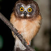 "Juvenile Northern Saw Whet Owl © 2010 Nova Mackentley  Whitefish Point, MI JSE  <div class=""ss-paypal-button""><div class=""ss-paypal-add-to-cart-section""><div class=""ss-paypal-product-options""><h4>Mat Sizes</h4><ul><li><a href=""https://www.paypal.com/cgi-bin/webscr?cmd=_cart&amp;business=T77V5VKCW4K2U&amp;lc=US&amp;item_name=Juvenile%20Northern%20Saw%20Whet%20Owl%20%C2%A9%202010%20Nova%20Mackentley%20%20Whitefish%20Point%2C%20MI%20JSE&amp;item_number=http%3A%2F%2Fwww.nightflightimages.com%2FGalleries-1%2FOwls%2Fi-8X6gfzX&amp;button_subtype=products&amp;no_note=0&amp;cn=Add%20special%20instructions%20to%20the%20seller%3A&amp;no_shipping=2&amp;currency_code=USD&amp;weight_unit=lbs&amp;add=1&amp;bn=PP-ShopCartBF%3Abtn_cart_SM.gif%3ANonHosted&amp;on0=Mat%20Sizes&amp;option_select0=5%20x%207&amp;option_amount0=10.00&amp;option_select1=8%20x%2010&amp;option_amount1=18.00&amp;option_select2=11%20x%2014&amp;option_amount2=28.00&amp;option_select3=card&amp;option_amount3=4.00&amp;option_index=0&amp;charset=utf-8&amp;submit=&amp;os0=5%20x%207"" target=""paypal""><span>5 x 7 $11.00 USD</span><img src=""https://www.paypalobjects.com/en_US/i/btn/btn_cart_SM.gif""></a></li><li><a href=""https://www.paypal.com/cgi-bin/webscr?cmd=_cart&amp;business=T77V5VKCW4K2U&amp;lc=US&amp;item_name=Juvenile%20Northern%20Saw%20Whet%20Owl%20%C2%A9%202010%20Nova%20Mackentley%20%20Whitefish%20Point%2C%20MI%20JSE&amp;item_number=http%3A%2F%2Fwww.nightflightimages.com%2FGalleries-1%2FOwls%2Fi-8X6gfzX&amp;button_subtype=products&amp;no_note=0&amp;cn=Add%20special%20instructions%20to%20the%20seller%3A&amp;no_shipping=2&amp;currency_code=USD&amp;weight_unit=lbs&amp;add=1&amp;bn=PP-ShopCartBF%3Abtn_cart_SM.gif%3ANonHosted&amp;on0=Mat%20Sizes&amp;option_select0=5%20x%207&amp;option_amount0=10.00&amp;option_select1=8%20x%2010&amp;option_amount1=18.00&amp;option_select2=11%20x%2014&amp;option_amount2=28.00&amp;option_select3=card&amp;option_amount3=4.00&amp;option_index=0&amp;charset=utf-8&amp;submit=&amp;os0=8%20x%2010"" target=""paypal""><span>8 x 10 $19.00 USD</span><img src=""https://www.paypalobjects.com/en_US/i/btn/btn_cart_SM.gif""></a></li><li><a href=""https://www.paypal.com/cgi-bin/webscr?cmd=_cart&amp;business=T77V5VKCW4K2U&amp;lc=US&amp;item_name=Juvenile%20Northern%20Saw%20Whet%20Owl%20%C2%A9%202010%20Nova%20Mackentley%20%20Whitefish%20Point%2C%20MI%20JSE&amp;item_number=http%3A%2F%2Fwww.nightflightimages.com%2FGalleries-1%2FOwls%2Fi-8X6gfzX&amp;button_subtype=products&amp;no_note=0&amp;cn=Add%20special%20instructions%20to%20the%20seller%3A&amp;no_shipping=2&amp;currency_code=USD&amp;weight_unit=lbs&amp;add=1&amp;bn=PP-ShopCartBF%3Abtn_cart_SM.gif%3ANonHosted&amp;on0=Mat%20Sizes&amp;option_select0=5%20x%207&amp;option_amount0=10.00&amp;option_select1=8%20x%2010&amp;option_amount1=18.00&amp;option_select2=11%20x%2014&amp;option_amount2=28.00&amp;option_select3=card&amp;option_amount3=4.00&amp;option_index=0&amp;charset=utf-8&amp;submit=&amp;os0=11%20x%2014"" target=""paypal""><span>11 x 14 $29.00 USD</span><img src=""https://www.paypalobjects.com/en_US/i/btn/btn_cart_SM.gif""></a></li><li><a href=""https://www.paypal.com/cgi-bin/webscr?cmd=_cart&amp;business=T77V5VKCW4K2U&amp;lc=US&amp;item_name=Juvenile%20Northern%20Saw%20Whet%20Owl%20%C2%A9%202010%20Nova%20Mackentley%20%20Whitefish%20Point%2C%20MI%20JSE&amp;item_number=http%3A%2F%2Fwww.nightflightimages.com%2FGalleries-1%2FOwls%2Fi-8X6gfzX&amp;button_subtype=products&amp;no_note=0&amp;cn=Add%20special%20instructions%20to%20the%20seller%3A&amp;no_shipping=2&amp;currency_code=USD&amp;weight_unit=lbs&amp;add=1&amp;bn=PP-ShopCartBF%3Abtn_cart_SM.gif%3ANonHosted&amp;on0=Mat%20Sizes&amp;option_select0=5%20x%207&amp;option_amount0=10.00&amp;option_select1=8%20x%2010&amp;option_amount1=18.00&amp;option_select2=11%20x%2014&amp;option_amount2=28.00&amp;option_select3=card&amp;option_amount3=4.00&amp;option_index=0&amp;charset=utf-8&amp;submit=&amp;os0=card"" target=""paypal""><span>card $5.00 USD</span><img src=""https://www.paypalobjects.com/en_US/i/btn/btn_cart_SM.gif""></a></li></ul></div></div> <div class=""ss-paypal-view-cart-section""><a href=""https://www.paypal.com/cgi-bin/webscr?cmd=_cart&amp;business=T77V5VKCW4K2U&amp;display=1&amp;item_name=Juvenile%20Northern%20Saw%20Whet%20Owl%20%C2%A9%202010%20Nova%20Mackentley%20%20Whitefish%20Point%2C%20MI%20JSE&amp;item_number=http%3A%2F%2Fwww.nightflightimages.com%2FGalleries-1%2FOwls%2Fi-8X6gfzX&amp;charset=utf-8&amp;submit="" target=""paypal"" class=""ss-paypal-submit-button""><img src=""https://www.paypalobjects.com/en_US/i/btn/btn_viewcart_LG.gif""></a></div></div><div class=""ss-paypal-button-end""></div>"