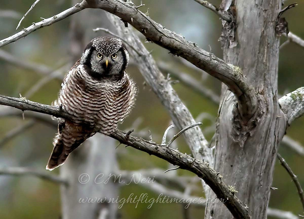 """Northern Hawk Owl © 2009 C. M. Neri Whitefish Point, MI NHOWWP  <div class=""""ss-paypal-button""""><div class=""""ss-paypal-add-to-cart-section""""><div class=""""ss-paypal-product-options""""><h4>Mat Sizes</h4><ul><li><a href=""""https://www.paypal.com/cgi-bin/webscr?cmd=_cart&business=T77V5VKCW4K2U&lc=US&item_name=Northern%20Hawk%20Owl%20%C2%A9%202009%20C.%20M.%20Neri%20Whitefish%20Point%2C%20MI%20NHOWWP&item_number=http%3A%2F%2Fwww.nightflightimages.com%2FGalleries-1%2FOwls%2Fi-9DtjnWt&button_subtype=products&no_note=0&cn=Add%20special%20instructions%20to%20the%20seller%3A&no_shipping=2&currency_code=USD&weight_unit=lbs&add=1&bn=PP-ShopCartBF%3Abtn_cart_SM.gif%3ANonHosted&on0=Mat%20Sizes&option_select0=5%20x%207&option_amount0=10.00&option_select1=8%20x%2010&option_amount1=18.00&option_select2=11%20x%2014&option_amount2=28.00&option_select3=card&option_amount3=4.00&option_index=0&charset=utf-8&submit=&os0=5%20x%207"""" target=""""paypal""""><span>5 x 7 $11.00 USD</span><img src=""""https://www.paypalobjects.com/en_US/i/btn/btn_cart_SM.gif""""></a></li><li><a href=""""https://www.paypal.com/cgi-bin/webscr?cmd=_cart&business=T77V5VKCW4K2U&lc=US&item_name=Northern%20Hawk%20Owl%20%C2%A9%202009%20C.%20M.%20Neri%20Whitefish%20Point%2C%20MI%20NHOWWP&item_number=http%3A%2F%2Fwww.nightflightimages.com%2FGalleries-1%2FOwls%2Fi-9DtjnWt&button_subtype=products&no_note=0&cn=Add%20special%20instructions%20to%20the%20seller%3A&no_shipping=2&currency_code=USD&weight_unit=lbs&add=1&bn=PP-ShopCartBF%3Abtn_cart_SM.gif%3ANonHosted&on0=Mat%20Sizes&option_select0=5%20x%207&option_amount0=10.00&option_select1=8%20x%2010&option_amount1=18.00&option_select2=11%20x%2014&option_amount2=28.00&option_select3=card&option_amount3=4.00&option_index=0&charset=utf-8&submit=&os0=8%20x%2010"""" target=""""paypal""""><span>8 x 10 $19.00 USD</span><img src=""""https://www.paypalobjects.com/en_US/i/btn/btn_cart_SM.gif""""></a></li><li><a href=""""https://www.paypal.com/cgi-bin/webscr?cmd=_cart&business=T77V5VKCW4K2U&lc=US&item_name=Northern%20Hawk%20Owl%20"""