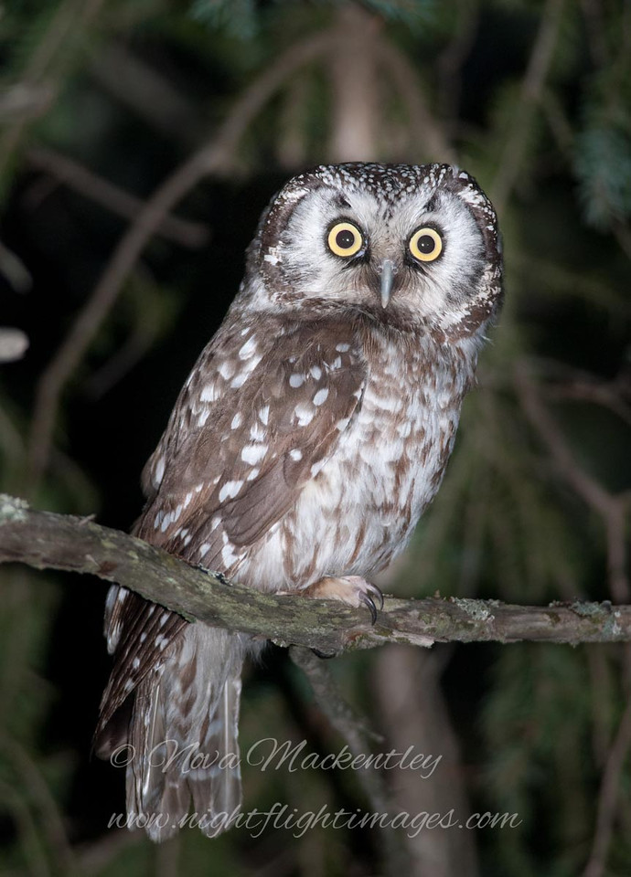 """Boreal Owl © 2009 Nova Mackentley Whitefish Point, MI BOO  <div class=""""ss-paypal-button""""><div class=""""ss-paypal-add-to-cart-section""""><div class=""""ss-paypal-product-options""""><h4>Mat Sizes</h4><ul><li><a href=""""https://www.paypal.com/cgi-bin/webscr?cmd=_cart&business=T77V5VKCW4K2U&lc=US&item_name=Boreal%20Owl%20%C2%A9%202009%20Nova%20Mackentley%20Whitefish%20Point%2C%20MI%20BOO&item_number=http%3A%2F%2Fwww.nightflightimages.com%2FGalleries-1%2FUpper-Peninsula-of-MI%2Fi-DKQv4LK&button_subtype=products&no_note=0&cn=Add%20special%20instructions%20to%20the%20seller%3A&no_shipping=2&currency_code=USD&weight_unit=lbs&add=1&bn=PP-ShopCartBF%3Abtn_cart_SM.gif%3ANonHosted&on0=Mat%20Sizes&option_select0=5%20x%207&option_amount0=10.00&option_select1=8%20x%2010&option_amount1=18.00&option_select2=11%20x%2014&option_amount2=28.00&option_select3=card&option_amount3=4.00&option_index=0&charset=utf-8&submit=&os0=5%20x%207"""" target=""""paypal""""><span>5 x 7 $11.00 USD</span><img src=""""https://www.paypalobjects.com/en_US/i/btn/btn_cart_SM.gif""""></a></li><li><a href=""""https://www.paypal.com/cgi-bin/webscr?cmd=_cart&business=T77V5VKCW4K2U&lc=US&item_name=Boreal%20Owl%20%C2%A9%202009%20Nova%20Mackentley%20Whitefish%20Point%2C%20MI%20BOO&item_number=http%3A%2F%2Fwww.nightflightimages.com%2FGalleries-1%2FUpper-Peninsula-of-MI%2Fi-DKQv4LK&button_subtype=products&no_note=0&cn=Add%20special%20instructions%20to%20the%20seller%3A&no_shipping=2&currency_code=USD&weight_unit=lbs&add=1&bn=PP-ShopCartBF%3Abtn_cart_SM.gif%3ANonHosted&on0=Mat%20Sizes&option_select0=5%20x%207&option_amount0=10.00&option_select1=8%20x%2010&option_amount1=18.00&option_select2=11%20x%2014&option_amount2=28.00&option_select3=card&option_amount3=4.00&option_index=0&charset=utf-8&submit=&os0=8%20x%2010"""" target=""""paypal""""><span>8 x 10 $19.00 USD</span><img src=""""https://www.paypalobjects.com/en_US/i/btn/btn_cart_SM.gif""""></a></li><li><a href=""""https://www.paypal.com/cgi-bin/webscr?cmd=_cart&business=T77V5VKCW4K2U&lc=US&item_name=Boreal%20Owl%"""