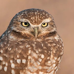 Burrowing Owl  © 2010 C. M. Neri Salton Sea, CA BUOW  Mat Sizes5 x 7 $11.00 USD8 x 10 $19.00 USD11 x 14 $29.00 USDcard $5.00 USD