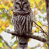 Barred Owl in fall © 2007 Chris Neri  Whitefish Point, MI