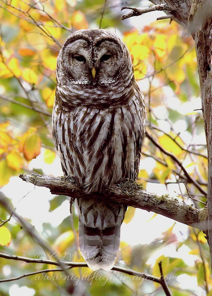 """Barred Owl and fall colors © 2007 Chris Neri  Whitefish Point, MI  BDOWP  <div class=""""ss-paypal-button""""><div class=""""ss-paypal-add-to-cart-section""""><div class=""""ss-paypal-product-options""""><h4>Mat Sizes</h4><ul><li><a href=""""https://www.paypal.com/cgi-bin/webscr?cmd=_cart&business=T77V5VKCW4K2U&lc=US&item_name=Barred%20Owl%20and%20fall%20colors%20%C2%A9%202007%20Chris%20Neri%20%20Whitefish%20Point%2C%20MI%20%20BDOWP&item_number=http%3A%2F%2Fwww.nightflightimages.com%2FGalleries-1%2FOwls%2Fi-GB4BHSL&button_subtype=products&no_note=0&cn=Add%20special%20instructions%20to%20the%20seller%3A&no_shipping=2&currency_code=USD&weight_unit=lbs&add=1&bn=PP-ShopCartBF%3Abtn_cart_SM.gif%3ANonHosted&on0=Mat%20Sizes&option_select0=5%20x%207&option_amount0=10.00&option_select1=8%20x%2010&option_amount1=18.00&option_select2=11%20x%2014&option_amount2=28.00&option_select3=card&option_amount3=4.00&option_index=0&charset=utf-8&submit=&os0=5%20x%207"""" target=""""paypal""""><span>5 x 7 $11.00 USD</span><img src=""""https://www.paypalobjects.com/en_US/i/btn/btn_cart_SM.gif""""></a></li><li><a href=""""https://www.paypal.com/cgi-bin/webscr?cmd=_cart&business=T77V5VKCW4K2U&lc=US&item_name=Barred%20Owl%20and%20fall%20colors%20%C2%A9%202007%20Chris%20Neri%20%20Whitefish%20Point%2C%20MI%20%20BDOWP&item_number=http%3A%2F%2Fwww.nightflightimages.com%2FGalleries-1%2FOwls%2Fi-GB4BHSL&button_subtype=products&no_note=0&cn=Add%20special%20instructions%20to%20the%20seller%3A&no_shipping=2&currency_code=USD&weight_unit=lbs&add=1&bn=PP-ShopCartBF%3Abtn_cart_SM.gif%3ANonHosted&on0=Mat%20Sizes&option_select0=5%20x%207&option_amount0=10.00&option_select1=8%20x%2010&option_amount1=18.00&option_select2=11%20x%2014&option_amount2=28.00&option_select3=card&option_amount3=4.00&option_index=0&charset=utf-8&submit=&os0=8%20x%2010"""" target=""""paypal""""><span>8 x 10 $19.00 USD</span><img src=""""https://www.paypalobjects.com/en_US/i/btn/btn_cart_SM.gif""""></a></li><li><a href=""""https://www.paypal.com/cgi-bin/webscr?cmd=_cart&business=T77V5VKCW4K2"""