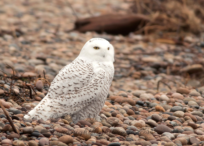 """Snowy Owl © 2017 Chris M Neri Whitefish Point, MI SN17r  <div class=""""ss-paypal-button""""><div class=""""ss-paypal-add-to-cart-section""""><div class=""""ss-paypal-product-options""""><h4>Mat Sizes</h4><ul><li><a href=""""https://www.paypal.com/cgi-bin/webscr?cmd=_cart&business=T77V5VKCW4K2U&lc=US&item_name=Snowy%20Owl%20%C2%A9%202017%20Chris%20M%20Neri%20Whitefish%20Point%2C%20MI%20SN17r&item_number=http%3A%2F%2Fwww.nightflightimages.com%2FGalleries-1%2FNew%2Fi-GRJKzRr&button_subtype=products&no_note=0&cn=Add%20special%20instructions%20to%20the%20seller%3A&no_shipping=2&currency_code=USD&weight_unit=lbs&add=1&bn=PP-ShopCartBF%3Abtn_cart_SM.gif%3ANonHosted&on0=Mat%20Sizes&option_select0=5%20x%207&option_amount0=12.00&option_select1=8%20x%2010&option_amount1=19.00&option_select2=11%20x%2014&option_amount2=29.00&option_select3=card&option_amount3=5.00&option_index=0&charset=utf-8&submit=&os0=5%20x%207"""" target=""""paypal""""><span>5 x 7 $12.00 USD</span><img src=""""https://www.paypalobjects.com/en_US/i/btn/btn_cart_SM.gif""""></a></li><li><a href=""""https://www.paypal.com/cgi-bin/webscr?cmd=_cart&business=T77V5VKCW4K2U&lc=US&item_name=Snowy%20Owl%20%C2%A9%202017%20Chris%20M%20Neri%20Whitefish%20Point%2C%20MI%20SN17r&item_number=http%3A%2F%2Fwww.nightflightimages.com%2FGalleries-1%2FNew%2Fi-GRJKzRr&button_subtype=products&no_note=0&cn=Add%20special%20instructions%20to%20the%20seller%3A&no_shipping=2&currency_code=USD&weight_unit=lbs&add=1&bn=PP-ShopCartBF%3Abtn_cart_SM.gif%3ANonHosted&on0=Mat%20Sizes&option_select0=5%20x%207&option_amount0=12.00&option_select1=8%20x%2010&option_amount1=19.00&option_select2=11%20x%2014&option_amount2=29.00&option_select3=card&option_amount3=5.00&option_index=0&charset=utf-8&submit=&os0=8%20x%2010"""" target=""""paypal""""><span>8 x 10 $19.00 USD</span><img src=""""https://www.paypalobjects.com/en_US/i/btn/btn_cart_SM.gif""""></a></li><li><a href=""""https://www.paypal.com/cgi-bin/webscr?cmd=_cart&business=T77V5VKCW4K2U&lc=US&item_name=Snowy%20Owl%20%C2%A9%202017%20Chris%20M%20Neri%20Wh"""