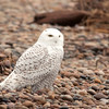 "Snowy Owl © 2017 Chris M Neri Whitefish Point, MI SN17r  <div class=""ss-paypal-button""><div class=""ss-paypal-add-to-cart-section""><div class=""ss-paypal-product-options""><h4>Mat Sizes</h4><ul><li><a href=""https://www.paypal.com/cgi-bin/webscr?cmd=_cart&business=T77V5VKCW4K2U&lc=US&item_name=Snowy%20Owl%20%C2%A9%202017%20Chris%20M%20Neri%20Whitefish%20Point%2C%20MI%20SN17r&item_number=http%3A%2F%2Fwww.nightflightimages.com%2FGalleries-1%2FNew%2Fi-GRJKzRr&button_subtype=products&no_note=0&cn=Add%20special%20instructions%20to%20the%20seller%3A&no_shipping=2&currency_code=USD&weight_unit=lbs&add=1&bn=PP-ShopCartBF%3Abtn_cart_SM.gif%3ANonHosted&on0=Mat%20Sizes&option_select0=5%20x%207&option_amount0=12.00&option_select1=8%20x%2010&option_amount1=19.00&option_select2=11%20x%2014&option_amount2=29.00&option_select3=card&option_amount3=5.00&option_index=0&charset=utf-8&submit=&os0=5%20x%207"" target=""paypal""><span>5 x 7 $12.00 USD</span><img src=""https://www.paypalobjects.com/en_US/i/btn/btn_cart_SM.gif""></a></li><li><a href=""https://www.paypal.com/cgi-bin/webscr?cmd=_cart&business=T77V5VKCW4K2U&lc=US&item_name=Snowy%20Owl%20%C2%A9%202017%20Chris%20M%20Neri%20Whitefish%20Point%2C%20MI%20SN17r&item_number=http%3A%2F%2Fwww.nightflightimages.com%2FGalleries-1%2FNew%2Fi-GRJKzRr&button_subtype=products&no_note=0&cn=Add%20special%20instructions%20to%20the%20seller%3A&no_shipping=2&currency_code=USD&weight_unit=lbs&add=1&bn=PP-ShopCartBF%3Abtn_cart_SM.gif%3ANonHosted&on0=Mat%20Sizes&option_select0=5%20x%207&option_amount0=12.00&option_select1=8%20x%2010&option_amount1=19.00&option_select2=11%20x%2014&option_amount2=29.00&option_select3=card&option_amount3=5.00&option_index=0&charset=utf-8&submit=&os0=8%20x%2010"" target=""paypal""><span>8 x 10 $19.00 USD</span><img src=""https://www.paypalobjects.com/en_US/i/btn/btn_cart_SM.gif""></a></li><li><a href=""https://www.paypal.com/cgi-bin/webscr?cmd=_cart&business=T77V5VKCW4K2U&lc=US&item_name=Snowy%20Owl%20%C2%A9%202017%20Chris%20M%20Neri%20Whitefish%20Point%2C%20MI%20SN17r&item_number=http%3A%2F%2Fwww.nightflightimages.com%2FGalleries-1%2FNew%2Fi-GRJKzRr&button_subtype=products&no_note=0&cn=Add%20special%20instructions%20to%20the%20seller%3A&no_shipping=2&currency_code=USD&weight_unit=lbs&add=1&bn=PP-ShopCartBF%3Abtn_cart_SM.gif%3ANonHosted&on0=Mat%20Sizes&option_select0=5%20x%207&option_amount0=12.00&option_select1=8%20x%2010&option_amount1=19.00&option_select2=11%20x%2014&option_amount2=29.00&option_select3=card&option_amount3=5.00&option_index=0&charset=utf-8&submit=&os0=11%20x%2014"" target=""paypal""><span>11 x 14 $29.00 USD</span><img src=""https://www.paypalobjects.com/en_US/i/btn/btn_cart_SM.gif""></a></li><li><a href=""https://www.paypal.com/cgi-bin/webscr?cmd=_cart&business=T77V5VKCW4K2U&lc=US&item_name=Snowy%20Owl%20%C2%A9%202017%20Chris%20M%20Neri%20Whitefish%20Point%2C%20MI%20SN17r&item_number=http%3A%2F%2Fwww.nightflightimages.com%2FGalleries-1%2FNew%2Fi-GRJKzRr&button_subtype=products&no_note=0&cn=Add%20special%20instructions%20to%20the%20seller%3A&no_shipping=2&currency_code=USD&weight_unit=lbs&add=1&bn=PP-ShopCartBF%3Abtn_cart_SM.gif%3ANonHosted&on0=Mat%20Sizes&option_select0=5%20x%207&option_amount0=12.00&option_select1=8%20x%2010&option_amount1=19.00&option_select2=11%20x%2014&option_amount2=29.00&option_select3=card&option_amount3=5.00&option_index=0&charset=utf-8&submit=&os0=card"" target=""paypal""><span>card $5.00 USD</span><img src=""https://www.paypalobjects.com/en_US/i/btn/btn_cart_SM.gif""></a></li></ul></div></div> <div class=""ss-paypal-view-cart-section""><a href=""https://www.paypal.com/cgi-bin/webscr?cmd=_cart&business=T77V5VKCW4K2U&display=1&item_name=Snowy%20Owl%20%C2%A9%202017%20Chris%20M%20Neri%20Whitefish%20Point%2C%20MI%20SN17r&item_number=http%3A%2F%2Fwww.nightflightimages.com%2FGalleries-1%2FNew%2Fi-GRJKzRr&charset=utf-8&submit="" target=""paypal"" class=""ss-paypal-submit-button""><img src=""https://www.paypalobjects.com/en_US/i/btn/btn_viewcart_LG.gif""></a></div></div><div class=""ss-paypal-button-end""></div>"