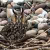 "Long-eared Owl © 2017 Chris M Neri Whitefish Point, MI LEOW17  <div class=""ss-paypal-button""><div class=""ss-paypal-add-to-cart-section""><div class=""ss-paypal-product-options""><h4>Mat Sizes</h4><ul><li><a href=""https://www.paypal.com/cgi-bin/webscr?cmd=_cart&business=T77V5VKCW4K2U&lc=US&item_name=Long-eared%20Owl%20%C2%A9%202017%20Chris%20M%20Neri%20Whitefish%20Point%2C%20MI%20LEOW17&item_number=http%3A%2F%2Fwww.nightflightimages.com%2FGalleries-1%2FNew%2Fi-HqVgN49&button_subtype=products&no_note=0&cn=Add%20special%20instructions%20to%20the%20seller%3A&no_shipping=2&currency_code=USD&weight_unit=lbs&add=1&bn=PP-ShopCartBF%3Abtn_cart_SM.gif%3ANonHosted&on0=Mat%20Sizes&option_select0=5%20x%207&option_amount0=12.00&option_select1=8%20x%2010&option_amount1=19.00&option_select2=11%20x%2014&option_amount2=29.00&option_select3=card&option_amount3=5.00&option_index=0&charset=utf-8&submit=&os0=5%20x%207"" target=""paypal""><span>5 x 7 $12.00 USD</span><img src=""https://www.paypalobjects.com/en_US/i/btn/btn_cart_SM.gif""></a></li><li><a href=""https://www.paypal.com/cgi-bin/webscr?cmd=_cart&business=T77V5VKCW4K2U&lc=US&item_name=Long-eared%20Owl%20%C2%A9%202017%20Chris%20M%20Neri%20Whitefish%20Point%2C%20MI%20LEOW17&item_number=http%3A%2F%2Fwww.nightflightimages.com%2FGalleries-1%2FNew%2Fi-HqVgN49&button_subtype=products&no_note=0&cn=Add%20special%20instructions%20to%20the%20seller%3A&no_shipping=2&currency_code=USD&weight_unit=lbs&add=1&bn=PP-ShopCartBF%3Abtn_cart_SM.gif%3ANonHosted&on0=Mat%20Sizes&option_select0=5%20x%207&option_amount0=12.00&option_select1=8%20x%2010&option_amount1=19.00&option_select2=11%20x%2014&option_amount2=29.00&option_select3=card&option_amount3=5.00&option_index=0&charset=utf-8&submit=&os0=8%20x%2010"" target=""paypal""><span>8 x 10 $19.00 USD</span><img src=""https://www.paypalobjects.com/en_US/i/btn/btn_cart_SM.gif""></a></li><li><a href=""https://www.paypal.com/cgi-bin/webscr?cmd=_cart&business=T77V5VKCW4K2U&lc=US&item_name=Long-eared%20Owl%20%C2%A9%202017%20Chris%20M%20Neri%20Whitefish%20Point%2C%20MI%20LEOW17&item_number=http%3A%2F%2Fwww.nightflightimages.com%2FGalleries-1%2FNew%2Fi-HqVgN49&button_subtype=products&no_note=0&cn=Add%20special%20instructions%20to%20the%20seller%3A&no_shipping=2&currency_code=USD&weight_unit=lbs&add=1&bn=PP-ShopCartBF%3Abtn_cart_SM.gif%3ANonHosted&on0=Mat%20Sizes&option_select0=5%20x%207&option_amount0=12.00&option_select1=8%20x%2010&option_amount1=19.00&option_select2=11%20x%2014&option_amount2=29.00&option_select3=card&option_amount3=5.00&option_index=0&charset=utf-8&submit=&os0=11%20x%2014"" target=""paypal""><span>11 x 14 $29.00 USD</span><img src=""https://www.paypalobjects.com/en_US/i/btn/btn_cart_SM.gif""></a></li><li><a href=""https://www.paypal.com/cgi-bin/webscr?cmd=_cart&business=T77V5VKCW4K2U&lc=US&item_name=Long-eared%20Owl%20%C2%A9%202017%20Chris%20M%20Neri%20Whitefish%20Point%2C%20MI%20LEOW17&item_number=http%3A%2F%2Fwww.nightflightimages.com%2FGalleries-1%2FNew%2Fi-HqVgN49&button_subtype=products&no_note=0&cn=Add%20special%20instructions%20to%20the%20seller%3A&no_shipping=2&currency_code=USD&weight_unit=lbs&add=1&bn=PP-ShopCartBF%3Abtn_cart_SM.gif%3ANonHosted&on0=Mat%20Sizes&option_select0=5%20x%207&option_amount0=12.00&option_select1=8%20x%2010&option_amount1=19.00&option_select2=11%20x%2014&option_amount2=29.00&option_select3=card&option_amount3=5.00&option_index=0&charset=utf-8&submit=&os0=card"" target=""paypal""><span>card $5.00 USD</span><img src=""https://www.paypalobjects.com/en_US/i/btn/btn_cart_SM.gif""></a></li></ul></div></div> <div class=""ss-paypal-view-cart-section""><a href=""https://www.paypal.com/cgi-bin/webscr?cmd=_cart&business=T77V5VKCW4K2U&display=1&item_name=Long-eared%20Owl%20%C2%A9%202017%20Chris%20M%20Neri%20Whitefish%20Point%2C%20MI%20LEOW17&item_number=http%3A%2F%2Fwww.nightflightimages.com%2FGalleries-1%2FNew%2Fi-HqVgN49&charset=utf-8&submit="" target=""paypal"" class=""ss-paypal-submit-button""><img src=""https://www.paypalobjects.com/en_US/i/btn/btn_viewcart_LG.gif""></a></div></div><div class=""ss-paypal-button-end""></div>"