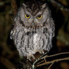 "Western Screech Owl © 2010 C. M. Neri  Big Lagoon, CA WESOCA  <div class=""ss-paypal-button""><div class=""ss-paypal-add-to-cart-section""><div class=""ss-paypal-product-options""><h4>Mat Sizes</h4><ul><li><a href=""https://www.paypal.com/cgi-bin/webscr?cmd=_cart&business=T77V5VKCW4K2U&lc=US&item_name=Western%20Screech%20Owl%20%C2%A9%202010%20C.%20M.%20Neri%20%20Big%20Lagoon%2C%20CA%20WESOCA&item_number=http%3A%2F%2Fwww.nightflightimages.com%2FGalleries-1%2FTravels%2Fi-KGqwMH8&button_subtype=products&no_note=0&cn=Add%20special%20instructions%20to%20the%20seller%3A&no_shipping=2&currency_code=USD&weight_unit=lbs&add=1&bn=PP-ShopCartBF%3Abtn_cart_SM.gif%3ANonHosted&on0=Mat%20Sizes&option_select0=5%20x%207&option_amount0=10.00&option_select1=8%20x%2010&option_amount1=18.00&option_select2=11%20x%2014&option_amount2=28.00&option_select3=card&option_amount3=4.00&option_index=0&charset=utf-8&submit=&os0=5%20x%207"" target=""paypal""><span>5 x 7 $11.00 USD</span><img src=""https://www.paypalobjects.com/en_US/i/btn/btn_cart_SM.gif""></a></li><li><a href=""https://www.paypal.com/cgi-bin/webscr?cmd=_cart&business=T77V5VKCW4K2U&lc=US&item_name=Western%20Screech%20Owl%20%C2%A9%202010%20C.%20M.%20Neri%20%20Big%20Lagoon%2C%20CA%20WESOCA&item_number=http%3A%2F%2Fwww.nightflightimages.com%2FGalleries-1%2FTravels%2Fi-KGqwMH8&button_subtype=products&no_note=0&cn=Add%20special%20instructions%20to%20the%20seller%3A&no_shipping=2&currency_code=USD&weight_unit=lbs&add=1&bn=PP-ShopCartBF%3Abtn_cart_SM.gif%3ANonHosted&on0=Mat%20Sizes&option_select0=5%20x%207&option_amount0=10.00&option_select1=8%20x%2010&option_amount1=18.00&option_select2=11%20x%2014&option_amount2=28.00&option_select3=card&option_amount3=4.00&option_index=0&charset=utf-8&submit=&os0=8%20x%2010"" target=""paypal""><span>8 x 10 $19.00 USD</span><img src=""https://www.paypalobjects.com/en_US/i/btn/btn_cart_SM.gif""></a></li><li><a href=""https://www.paypal.com/cgi-bin/webscr?cmd=_cart&business=T77V5VKCW4K2U&lc=US&item_name=Western%20Screech%20Owl%20%C2%A9%202010%20C.%20M.%20Neri%20%20Big%20Lagoon%2C%20CA%20WESOCA&item_number=http%3A%2F%2Fwww.nightflightimages.com%2FGalleries-1%2FTravels%2Fi-KGqwMH8&button_subtype=products&no_note=0&cn=Add%20special%20instructions%20to%20the%20seller%3A&no_shipping=2&currency_code=USD&weight_unit=lbs&add=1&bn=PP-ShopCartBF%3Abtn_cart_SM.gif%3ANonHosted&on0=Mat%20Sizes&option_select0=5%20x%207&option_amount0=10.00&option_select1=8%20x%2010&option_amount1=18.00&option_select2=11%20x%2014&option_amount2=28.00&option_select3=card&option_amount3=4.00&option_index=0&charset=utf-8&submit=&os0=11%20x%2014"" target=""paypal""><span>11 x 14 $29.00 USD</span><img src=""https://www.paypalobjects.com/en_US/i/btn/btn_cart_SM.gif""></a></li><li><a href=""https://www.paypal.com/cgi-bin/webscr?cmd=_cart&business=T77V5VKCW4K2U&lc=US&item_name=Western%20Screech%20Owl%20%C2%A9%202010%20C.%20M.%20Neri%20%20Big%20Lagoon%2C%20CA%20WESOCA&item_number=http%3A%2F%2Fwww.nightflightimages.com%2FGalleries-1%2FTravels%2Fi-KGqwMH8&button_subtype=products&no_note=0&cn=Add%20special%20instructions%20to%20the%20seller%3A&no_shipping=2&currency_code=USD&weight_unit=lbs&add=1&bn=PP-ShopCartBF%3Abtn_cart_SM.gif%3ANonHosted&on0=Mat%20Sizes&option_select0=5%20x%207&option_amount0=10.00&option_select1=8%20x%2010&option_amount1=18.00&option_select2=11%20x%2014&option_amount2=28.00&option_select3=card&option_amount3=4.00&option_index=0&charset=utf-8&submit=&os0=card"" target=""paypal""><span>card $5.00 USD</span><img src=""https://www.paypalobjects.com/en_US/i/btn/btn_cart_SM.gif""></a></li></ul></div></div> <div class=""ss-paypal-view-cart-section""><a href=""https://www.paypal.com/cgi-bin/webscr?cmd=_cart&business=T77V5VKCW4K2U&display=1&item_name=Western%20Screech%20Owl%20%C2%A9%202010%20C.%20M.%20Neri%20%20Big%20Lagoon%2C%20CA%20WESOCA&item_number=http%3A%2F%2Fwww.nightflightimages.com%2FGalleries-1%2FTravels%2Fi-KGqwMH8&charset=utf-8&submit="" target=""paypal"" class=""ss-paypal-submit-button""><img src=""https://www.paypalobjects.com/en_US/i/btn/btn_viewcart_LG.gif""></a></div></div><div class=""ss-paypal-button-end""></div>"