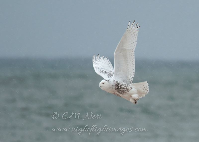 "Snowy Owl in flight over Lake Superior © 2013 C. M. Neri, Whitefish Point ,MI SNOWFLL <div class=""ss-paypal-button""><div class=""ss-paypal-add-to-cart-section""><div class=""ss-paypal-product-options""><h4>Mat Sizes</h4><ul><li><a href=""https://www.paypal.com/cgi-bin/webscr?cmd=_cart&business=T77V5VKCW4K2U&lc=US&item_name=Snowy%20Owl%20in%20flight%20over%20Lake%20Superior%20%C2%A9%202013%20C.%20M.%20Neri%2C%20Whitefish%20Point%20%2CMI%20SNOWFLL&item_number=http%3A%2F%2Fwww.nightflightimages.com%2FGalleries-1%2FOwls%2Fi-KS7sTC8&button_subtype=products&no_note=0&cn=Add%20special%20instructions%20to%20the%20seller%3A&no_shipping=2&currency_code=USD&weight_unit=lbs&add=1&bn=PP-ShopCartBF%3Abtn_cart_SM.gif%3ANonHosted&on0=Mat%20Sizes&option_select0=5%20x%207&option_amount0=10.00&option_select1=8%20x%2010&option_amount1=18.00&option_select2=11%20x%2014&option_amount2=28.00&option_select3=card&option_amount3=4.00&option_index=0&charset=utf-8&submit=&os0=5%20x%207"" target=""paypal""><span>5 x 7 $11.00 USD</span><img src=""https://www.paypalobjects.com/en_US/i/btn/btn_cart_SM.gif""></a></li><li><a href=""https://www.paypal.com/cgi-bin/webscr?cmd=_cart&business=T77V5VKCW4K2U&lc=US&item_name=Snowy%20Owl%20in%20flight%20over%20Lake%20Superior%20%C2%A9%202013%20C.%20M.%20Neri%2C%20Whitefish%20Point%20%2CMI%20SNOWFLL&item_number=http%3A%2F%2Fwww.nightflightimages.com%2FGalleries-1%2FOwls%2Fi-KS7sTC8&button_subtype=products&no_note=0&cn=Add%20special%20instructions%20to%20the%20seller%3A&no_shipping=2&currency_code=USD&weight_unit=lbs&add=1&bn=PP-ShopCartBF%3Abtn_cart_SM.gif%3ANonHosted&on0=Mat%20Sizes&option_select0=5%20x%207&option_amount0=10.00&option_select1=8%20x%2010&option_amount1=18.00&option_select2=11%20x%2014&option_amount2=28.00&option_select3=card&option_amount3=4.00&option_index=0&charset=utf-8&submit=&os0=8%20x%2010"" target=""paypal""><span>8 x 10 $19.00 USD</span><img src=""https://www.paypalobjects.com/en_US/i/btn/btn_cart_SM.gif""></a></li><li><a href=""https://www.paypal.com/cgi-bin/webscr?cmd=_cart&business=T77V5VKCW4K2U&lc=US&item_name=Snowy%20Owl%20in%20flight%20over%20Lake%20Superior%20%C2%A9%202013%20C.%20M.%20Neri%2C%20Whitefish%20Point%20%2CMI%20SNOWFLL&item_number=http%3A%2F%2Fwww.nightflightimages.com%2FGalleries-1%2FOwls%2Fi-KS7sTC8&button_subtype=products&no_note=0&cn=Add%20special%20instructions%20to%20the%20seller%3A&no_shipping=2&currency_code=USD&weight_unit=lbs&add=1&bn=PP-ShopCartBF%3Abtn_cart_SM.gif%3ANonHosted&on0=Mat%20Sizes&option_select0=5%20x%207&option_amount0=10.00&option_select1=8%20x%2010&option_amount1=18.00&option_select2=11%20x%2014&option_amount2=28.00&option_select3=card&option_amount3=4.00&option_index=0&charset=utf-8&submit=&os0=11%20x%2014"" target=""paypal""><span>11 x 14 $29.00 USD</span><img src=""https://www.paypalobjects.com/en_US/i/btn/btn_cart_SM.gif""></a></li><li><a href=""https://www.paypal.com/cgi-bin/webscr?cmd=_cart&business=T77V5VKCW4K2U&lc=US&item_name=Snowy%20Owl%20in%20flight%20over%20Lake%20Superior%20%C2%A9%202013%20C.%20M.%20Neri%2C%20Whitefish%20Point%20%2CMI%20SNOWFLL&item_number=http%3A%2F%2Fwww.nightflightimages.com%2FGalleries-1%2FOwls%2Fi-KS7sTC8&button_subtype=products&no_note=0&cn=Add%20special%20instructions%20to%20the%20seller%3A&no_shipping=2&currency_code=USD&weight_unit=lbs&add=1&bn=PP-ShopCartBF%3Abtn_cart_SM.gif%3ANonHosted&on0=Mat%20Sizes&option_select0=5%20x%207&option_amount0=10.00&option_select1=8%20x%2010&option_amount1=18.00&option_select2=11%20x%2014&option_amount2=28.00&option_select3=card&option_amount3=4.00&option_index=0&charset=utf-8&submit=&os0=card"" target=""paypal""><span>card $5.00 USD</span><img src=""https://www.paypalobjects.com/en_US/i/btn/btn_cart_SM.gif""></a></li></ul></div></div> <div class=""ss-paypal-view-cart-section""><a href=""https://www.paypal.com/cgi-bin/webscr?cmd=_cart&business=T77V5VKCW4K2U&display=1&item_name=Snowy%20Owl%20in%20flight%20over%20Lake%20Superior%20%C2%A9%202013%20C.%20M.%20Neri%2C%20Whitefish%20Point%20%2CMI%20SNOWFLL&item_number=http%3A%2F%2Fwww.nightflightimages.com%2FGalleries-1%2FOwls%2Fi-KS7sTC8&charset=utf-8&submit="" target=""paypal"" class=""ss-paypal-submit-button""><img src=""https://www.paypalobjects.com/en_US/i/btn/btn_viewcart_LG.gif""></a></div></div><div class=""ss-paypal-button-end""></div>"