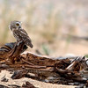 "Noerthern Saw-whet Owl on driftwood  © 2010 C. M. Neri Whitefish Point, MI NSWODFTW  <div class=""ss-paypal-button""><div class=""ss-paypal-add-to-cart-section""><div class=""ss-paypal-product-options""><h4>Mat Sizes</h4><ul><li><a href=""https://www.paypal.com/cgi-bin/webscr?cmd=_cart&business=T77V5VKCW4K2U&lc=US&item_name=Noerthern%20Saw-whet%20Owl%20on%20driftwood%20%20%C2%A9%202010%20C.%20M.%20Neri%20Whitefish%20Point%2C%20MI%20NSWODFTW&item_number=http%3A%2F%2Fwww.nightflightimages.com%2FGalleries-1%2FUpper-Peninsula-of-MI%2Fi-NqtbFwN&button_subtype=products&no_note=0&cn=Add%20special%20instructions%20to%20the%20seller%3A&no_shipping=2&currency_code=USD&weight_unit=lbs&add=1&bn=PP-ShopCartBF%3Abtn_cart_SM.gif%3ANonHosted&on0=Mat%20Sizes&option_select0=5%20x%207&option_amount0=10.00&option_select1=8%20x%2010&option_amount1=18.00&option_select2=11%20x%2014&option_amount2=28.00&option_select3=card&option_amount3=4.00&option_index=0&charset=utf-8&submit=&os0=5%20x%207"" target=""paypal""><span>5 x 7 $11.00 USD</span><img src=""https://www.paypalobjects.com/en_US/i/btn/btn_cart_SM.gif""></a></li><li><a href=""https://www.paypal.com/cgi-bin/webscr?cmd=_cart&business=T77V5VKCW4K2U&lc=US&item_name=Noerthern%20Saw-whet%20Owl%20on%20driftwood%20%20%C2%A9%202010%20C.%20M.%20Neri%20Whitefish%20Point%2C%20MI%20NSWODFTW&item_number=http%3A%2F%2Fwww.nightflightimages.com%2FGalleries-1%2FUpper-Peninsula-of-MI%2Fi-NqtbFwN&button_subtype=products&no_note=0&cn=Add%20special%20instructions%20to%20the%20seller%3A&no_shipping=2&currency_code=USD&weight_unit=lbs&add=1&bn=PP-ShopCartBF%3Abtn_cart_SM.gif%3ANonHosted&on0=Mat%20Sizes&option_select0=5%20x%207&option_amount0=10.00&option_select1=8%20x%2010&option_amount1=18.00&option_select2=11%20x%2014&option_amount2=28.00&option_select3=card&option_amount3=4.00&option_index=0&charset=utf-8&submit=&os0=8%20x%2010"" target=""paypal""><span>8 x 10 $19.00 USD</span><img src=""https://www.paypalobjects.com/en_US/i/btn/btn_cart_SM.gif""></a></li><li><a href=""https://www.paypal.com/cgi-bin/webscr?cmd=_cart&business=T77V5VKCW4K2U&lc=US&item_name=Noerthern%20Saw-whet%20Owl%20on%20driftwood%20%20%C2%A9%202010%20C.%20M.%20Neri%20Whitefish%20Point%2C%20MI%20NSWODFTW&item_number=http%3A%2F%2Fwww.nightflightimages.com%2FGalleries-1%2FUpper-Peninsula-of-MI%2Fi-NqtbFwN&button_subtype=products&no_note=0&cn=Add%20special%20instructions%20to%20the%20seller%3A&no_shipping=2&currency_code=USD&weight_unit=lbs&add=1&bn=PP-ShopCartBF%3Abtn_cart_SM.gif%3ANonHosted&on0=Mat%20Sizes&option_select0=5%20x%207&option_amount0=10.00&option_select1=8%20x%2010&option_amount1=18.00&option_select2=11%20x%2014&option_amount2=28.00&option_select3=card&option_amount3=4.00&option_index=0&charset=utf-8&submit=&os0=11%20x%2014"" target=""paypal""><span>11 x 14 $29.00 USD</span><img src=""https://www.paypalobjects.com/en_US/i/btn/btn_cart_SM.gif""></a></li><li><a href=""https://www.paypal.com/cgi-bin/webscr?cmd=_cart&business=T77V5VKCW4K2U&lc=US&item_name=Noerthern%20Saw-whet%20Owl%20on%20driftwood%20%20%C2%A9%202010%20C.%20M.%20Neri%20Whitefish%20Point%2C%20MI%20NSWODFTW&item_number=http%3A%2F%2Fwww.nightflightimages.com%2FGalleries-1%2FUpper-Peninsula-of-MI%2Fi-NqtbFwN&button_subtype=products&no_note=0&cn=Add%20special%20instructions%20to%20the%20seller%3A&no_shipping=2&currency_code=USD&weight_unit=lbs&add=1&bn=PP-ShopCartBF%3Abtn_cart_SM.gif%3ANonHosted&on0=Mat%20Sizes&option_select0=5%20x%207&option_amount0=10.00&option_select1=8%20x%2010&option_amount1=18.00&option_select2=11%20x%2014&option_amount2=28.00&option_select3=card&option_amount3=4.00&option_index=0&charset=utf-8&submit=&os0=card"" target=""paypal""><span>card $5.00 USD</span><img src=""https://www.paypalobjects.com/en_US/i/btn/btn_cart_SM.gif""></a></li></ul></div></div> <div class=""ss-paypal-view-cart-section""><a href=""https://www.paypal.com/cgi-bin/webscr?cmd=_cart&business=T77V5VKCW4K2U&display=1&item_name=Noerthern%20Saw-whet%20Owl%20on%20driftwood%20%20%C2%A9%202010%20C.%20M.%20Neri%20Whitefish%20Point%2C%20MI%20NSWODFTW&item_number=http%3A%2F%2Fwww.nightflightimages.com%2FGalleries-1%2FUpper-Peninsula-of-MI%2Fi-NqtbFwN&charset=utf-8&submit="" target=""paypal"" class=""ss-paypal-submit-button""><img src=""https://www.paypalobjects.com/en_US/i/btn/btn_viewcart_LG.gif""></a></div></div><div class=""ss-paypal-button-end""></div>"