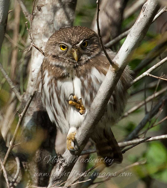 "Ferruginous Pygmy-Owl © 2009 Nova Mackentley Laguna Atascosa NWR, TX FPO  <div class=""ss-paypal-button""><div class=""ss-paypal-add-to-cart-section""><div class=""ss-paypal-product-options""><h4>Mat Sizes</h4><ul><li><a href=""https://www.paypal.com/cgi-bin/webscr?cmd=_cart&business=T77V5VKCW4K2U&lc=US&item_name=Ferruginous%20Pygmy-Owl%20%C2%A9%202009%20Nova%20Mackentley%20Laguna%20Atascosa%20NWR%2C%20TX%20FPO&item_number=http%3A%2F%2Fwww.nightflightimages.com%2FGalleries-1%2FOwls%2Fi-PSBJDQj&button_subtype=products&no_note=0&cn=Add%20special%20instructions%20to%20the%20seller%3A&no_shipping=2&currency_code=USD&weight_unit=lbs&add=1&bn=PP-ShopCartBF%3Abtn_cart_SM.gif%3ANonHosted&on0=Mat%20Sizes&option_select0=5%20x%207&option_amount0=10.00&option_select1=8%20x%2010&option_amount1=18.00&option_select2=11%20x%2014&option_amount2=28.00&option_select3=card&option_amount3=4.00&option_index=0&charset=utf-8&submit=&os0=5%20x%207"" target=""paypal""><span>5 x 7 $11.00 USD</span><img src=""https://www.paypalobjects.com/en_US/i/btn/btn_cart_SM.gif""></a></li><li><a href=""https://www.paypal.com/cgi-bin/webscr?cmd=_cart&business=T77V5VKCW4K2U&lc=US&item_name=Ferruginous%20Pygmy-Owl%20%C2%A9%202009%20Nova%20Mackentley%20Laguna%20Atascosa%20NWR%2C%20TX%20FPO&item_number=http%3A%2F%2Fwww.nightflightimages.com%2FGalleries-1%2FOwls%2Fi-PSBJDQj&button_subtype=products&no_note=0&cn=Add%20special%20instructions%20to%20the%20seller%3A&no_shipping=2&currency_code=USD&weight_unit=lbs&add=1&bn=PP-ShopCartBF%3Abtn_cart_SM.gif%3ANonHosted&on0=Mat%20Sizes&option_select0=5%20x%207&option_amount0=10.00&option_select1=8%20x%2010&option_amount1=18.00&option_select2=11%20x%2014&option_amount2=28.00&option_select3=card&option_amount3=4.00&option_index=0&charset=utf-8&submit=&os0=8%20x%2010"" target=""paypal""><span>8 x 10 $19.00 USD</span><img src=""https://www.paypalobjects.com/en_US/i/btn/btn_cart_SM.gif""></a></li><li><a href=""https://www.paypal.com/cgi-bin/webscr?cmd=_cart&business=T77V5VKCW4K2U&lc=US&item_name=Ferruginous%20Pygmy-Owl%20%C2%A9%202009%20Nova%20Mackentley%20Laguna%20Atascosa%20NWR%2C%20TX%20FPO&item_number=http%3A%2F%2Fwww.nightflightimages.com%2FGalleries-1%2FOwls%2Fi-PSBJDQj&button_subtype=products&no_note=0&cn=Add%20special%20instructions%20to%20the%20seller%3A&no_shipping=2&currency_code=USD&weight_unit=lbs&add=1&bn=PP-ShopCartBF%3Abtn_cart_SM.gif%3ANonHosted&on0=Mat%20Sizes&option_select0=5%20x%207&option_amount0=10.00&option_select1=8%20x%2010&option_amount1=18.00&option_select2=11%20x%2014&option_amount2=28.00&option_select3=card&option_amount3=4.00&option_index=0&charset=utf-8&submit=&os0=11%20x%2014"" target=""paypal""><span>11 x 14 $29.00 USD</span><img src=""https://www.paypalobjects.com/en_US/i/btn/btn_cart_SM.gif""></a></li><li><a href=""https://www.paypal.com/cgi-bin/webscr?cmd=_cart&business=T77V5VKCW4K2U&lc=US&item_name=Ferruginous%20Pygmy-Owl%20%C2%A9%202009%20Nova%20Mackentley%20Laguna%20Atascosa%20NWR%2C%20TX%20FPO&item_number=http%3A%2F%2Fwww.nightflightimages.com%2FGalleries-1%2FOwls%2Fi-PSBJDQj&button_subtype=products&no_note=0&cn=Add%20special%20instructions%20to%20the%20seller%3A&no_shipping=2&currency_code=USD&weight_unit=lbs&add=1&bn=PP-ShopCartBF%3Abtn_cart_SM.gif%3ANonHosted&on0=Mat%20Sizes&option_select0=5%20x%207&option_amount0=10.00&option_select1=8%20x%2010&option_amount1=18.00&option_select2=11%20x%2014&option_amount2=28.00&option_select3=card&option_amount3=4.00&option_index=0&charset=utf-8&submit=&os0=card"" target=""paypal""><span>card $5.00 USD</span><img src=""https://www.paypalobjects.com/en_US/i/btn/btn_cart_SM.gif""></a></li></ul></div></div> <div class=""ss-paypal-view-cart-section""><a href=""https://www.paypal.com/cgi-bin/webscr?cmd=_cart&business=T77V5VKCW4K2U&display=1&item_name=Ferruginous%20Pygmy-Owl%20%C2%A9%202009%20Nova%20Mackentley%20Laguna%20Atascosa%20NWR%2C%20TX%20FPO&item_number=http%3A%2F%2Fwww.nightflightimages.com%2FGalleries-1%2FOwls%2Fi-PSBJDQj&charset=utf-8&submit="" target=""paypal"" class=""ss-paypal-submit-button""><img src=""https://www.paypalobjects.com/en_US/i/btn/btn_viewcart_LG.gif""></a></div></div><div class=""ss-paypal-button-end""></div>"