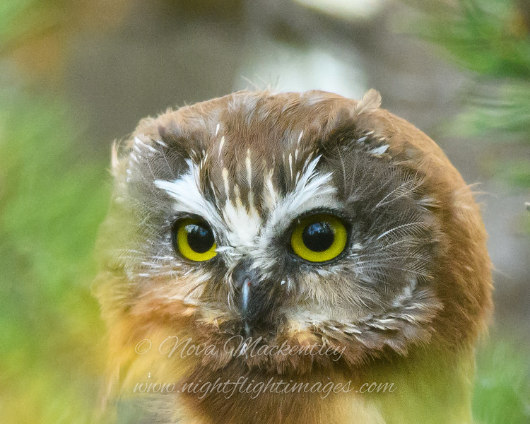 "Juvenile Saw-whet Owl © 2016 Nova Mackentley Whitefish Point, MI JSH  <div class=""ss-paypal-button""><div class=""ss-paypal-add-to-cart-section""><div class=""ss-paypal-product-options""><h4>Mat Sizes</h4><ul><li><a href=""https://www.paypal.com/cgi-bin/webscr?cmd=_cart&business=T77V5VKCW4K2U&lc=US&item_name=Juvenile%20Saw-whet%20Owl%20%C2%A9%202016%20Nova%20Mackentley%20Whitefish%20Point%2C%20MI%20JSH&item_number=http%3A%2F%2Fwww.nightflightimages.com%2FGalleries-1%2FNew%2Fi-PSN7qzb&button_subtype=products&no_note=0&cn=Add%20special%20instructions%20to%20the%20seller%3A&no_shipping=2&currency_code=USD&weight_unit=lbs&add=1&bn=PP-ShopCartBF%3Abtn_cart_SM.gif%3ANonHosted&on0=Mat%20Sizes&option_select0=5%20x%207&option_amount0=10.00&option_select1=8%20x%2010&option_amount1=18.00&option_select2=11%20x%2014&option_amount2=28.00&option_select3=card&option_amount3=4.00&option_index=0&charset=utf-8&submit=&os0=5%20x%207"" target=""paypal""><span>5 x 7 $11.00 USD</span><img src=""https://www.paypalobjects.com/en_US/i/btn/btn_cart_SM.gif""></a></li><li><a href=""https://www.paypal.com/cgi-bin/webscr?cmd=_cart&business=T77V5VKCW4K2U&lc=US&item_name=Juvenile%20Saw-whet%20Owl%20%C2%A9%202016%20Nova%20Mackentley%20Whitefish%20Point%2C%20MI%20JSH&item_number=http%3A%2F%2Fwww.nightflightimages.com%2FGalleries-1%2FNew%2Fi-PSN7qzb&button_subtype=products&no_note=0&cn=Add%20special%20instructions%20to%20the%20seller%3A&no_shipping=2&currency_code=USD&weight_unit=lbs&add=1&bn=PP-ShopCartBF%3Abtn_cart_SM.gif%3ANonHosted&on0=Mat%20Sizes&option_select0=5%20x%207&option_amount0=10.00&option_select1=8%20x%2010&option_amount1=18.00&option_select2=11%20x%2014&option_amount2=28.00&option_select3=card&option_amount3=4.00&option_index=0&charset=utf-8&submit=&os0=8%20x%2010"" target=""paypal""><span>8 x 10 $19.00 USD</span><img src=""https://www.paypalobjects.com/en_US/i/btn/btn_cart_SM.gif""></a></li><li><a href=""https://www.paypal.com/cgi-bin/webscr?cmd=_cart&business=T77V5VKCW4K2U&lc=US&item_name=Juvenile%20Saw-whet%20Owl%20%C2%A9%202016%20Nova%20Mackentley%20Whitefish%20Point%2C%20MI%20JSH&item_number=http%3A%2F%2Fwww.nightflightimages.com%2FGalleries-1%2FNew%2Fi-PSN7qzb&button_subtype=products&no_note=0&cn=Add%20special%20instructions%20to%20the%20seller%3A&no_shipping=2&currency_code=USD&weight_unit=lbs&add=1&bn=PP-ShopCartBF%3Abtn_cart_SM.gif%3ANonHosted&on0=Mat%20Sizes&option_select0=5%20x%207&option_amount0=10.00&option_select1=8%20x%2010&option_amount1=18.00&option_select2=11%20x%2014&option_amount2=28.00&option_select3=card&option_amount3=4.00&option_index=0&charset=utf-8&submit=&os0=11%20x%2014"" target=""paypal""><span>11 x 14 $29.00 USD</span><img src=""https://www.paypalobjects.com/en_US/i/btn/btn_cart_SM.gif""></a></li><li><a href=""https://www.paypal.com/cgi-bin/webscr?cmd=_cart&business=T77V5VKCW4K2U&lc=US&item_name=Juvenile%20Saw-whet%20Owl%20%C2%A9%202016%20Nova%20Mackentley%20Whitefish%20Point%2C%20MI%20JSH&item_number=http%3A%2F%2Fwww.nightflightimages.com%2FGalleries-1%2FNew%2Fi-PSN7qzb&button_subtype=products&no_note=0&cn=Add%20special%20instructions%20to%20the%20seller%3A&no_shipping=2&currency_code=USD&weight_unit=lbs&add=1&bn=PP-ShopCartBF%3Abtn_cart_SM.gif%3ANonHosted&on0=Mat%20Sizes&option_select0=5%20x%207&option_amount0=10.00&option_select1=8%20x%2010&option_amount1=18.00&option_select2=11%20x%2014&option_amount2=28.00&option_select3=card&option_amount3=4.00&option_index=0&charset=utf-8&submit=&os0=card"" target=""paypal""><span>card $5.00 USD</span><img src=""https://www.paypalobjects.com/en_US/i/btn/btn_cart_SM.gif""></a></li></ul></div></div> <div class=""ss-paypal-view-cart-section""><a href=""https://www.paypal.com/cgi-bin/webscr?cmd=_cart&business=T77V5VKCW4K2U&display=1&item_name=Juvenile%20Saw-whet%20Owl%20%C2%A9%202016%20Nova%20Mackentley%20Whitefish%20Point%2C%20MI%20JSH&item_number=http%3A%2F%2Fwww.nightflightimages.com%2FGalleries-1%2FNew%2Fi-PSN7qzb&charset=utf-8&submit="" target=""paypal"" class=""ss-paypal-submit-button""><img src=""https://www.paypalobjects.com/en_US/i/btn/btn_viewcart_LG.gif""></a></div></div><div class=""ss-paypal-button-end""></div>"