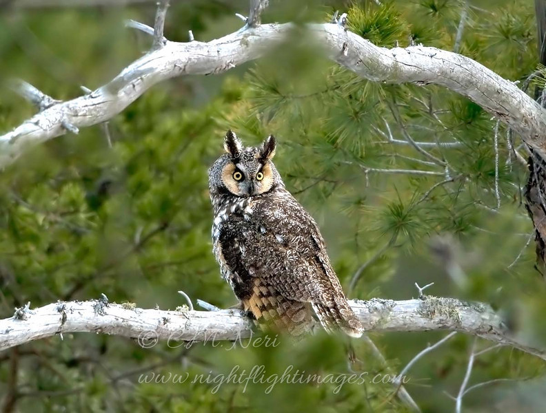 "Long-eared Owl  © 2008 C. M. Neri Whitefish Point, MI LEOWWP  <div class=""ss-paypal-button""><div class=""ss-paypal-add-to-cart-section""><div class=""ss-paypal-product-options""><h4>Mat Sizes</h4><ul><li><a href=""https://www.paypal.com/cgi-bin/webscr?cmd=_cart&business=T77V5VKCW4K2U&lc=US&item_name=Long-eared%20Owl%20%20%C2%A9%202008%20C.%20M.%20Neri%20Whitefish%20Point%2C%20MI%20LEOWWP&item_number=http%3A%2F%2Fwww.nightflightimages.com%2FGalleries-1%2FOwls%2Fi-Ph6ZFFb&button_subtype=products&no_note=0&cn=Add%20special%20instructions%20to%20the%20seller%3A&no_shipping=2&currency_code=USD&weight_unit=lbs&add=1&bn=PP-ShopCartBF%3Abtn_cart_SM.gif%3ANonHosted&on0=Mat%20Sizes&option_select0=5%20x%207&option_amount0=10.00&option_select1=8%20x%2010&option_amount1=18.00&option_select2=11%20x%2014&option_amount2=28.00&option_select3=card&option_amount3=4.00&option_index=0&charset=utf-8&submit=&os0=5%20x%207"" target=""paypal""><span>5 x 7 $11.00 USD</span><img src=""https://www.paypalobjects.com/en_US/i/btn/btn_cart_SM.gif""></a></li><li><a href=""https://www.paypal.com/cgi-bin/webscr?cmd=_cart&business=T77V5VKCW4K2U&lc=US&item_name=Long-eared%20Owl%20%20%C2%A9%202008%20C.%20M.%20Neri%20Whitefish%20Point%2C%20MI%20LEOWWP&item_number=http%3A%2F%2Fwww.nightflightimages.com%2FGalleries-1%2FOwls%2Fi-Ph6ZFFb&button_subtype=products&no_note=0&cn=Add%20special%20instructions%20to%20the%20seller%3A&no_shipping=2&currency_code=USD&weight_unit=lbs&add=1&bn=PP-ShopCartBF%3Abtn_cart_SM.gif%3ANonHosted&on0=Mat%20Sizes&option_select0=5%20x%207&option_amount0=10.00&option_select1=8%20x%2010&option_amount1=18.00&option_select2=11%20x%2014&option_amount2=28.00&option_select3=card&option_amount3=4.00&option_index=0&charset=utf-8&submit=&os0=8%20x%2010"" target=""paypal""><span>8 x 10 $19.00 USD</span><img src=""https://www.paypalobjects.com/en_US/i/btn/btn_cart_SM.gif""></a></li><li><a href=""https://www.paypal.com/cgi-bin/webscr?cmd=_cart&business=T77V5VKCW4K2U&lc=US&item_name=Long-eared%20Owl%20%20%C2%A9%202008%20C.%20M.%20Neri%20Whitefish%20Point%2C%20MI%20LEOWWP&item_number=http%3A%2F%2Fwww.nightflightimages.com%2FGalleries-1%2FOwls%2Fi-Ph6ZFFb&button_subtype=products&no_note=0&cn=Add%20special%20instructions%20to%20the%20seller%3A&no_shipping=2&currency_code=USD&weight_unit=lbs&add=1&bn=PP-ShopCartBF%3Abtn_cart_SM.gif%3ANonHosted&on0=Mat%20Sizes&option_select0=5%20x%207&option_amount0=10.00&option_select1=8%20x%2010&option_amount1=18.00&option_select2=11%20x%2014&option_amount2=28.00&option_select3=card&option_amount3=4.00&option_index=0&charset=utf-8&submit=&os0=11%20x%2014"" target=""paypal""><span>11 x 14 $29.00 USD</span><img src=""https://www.paypalobjects.com/en_US/i/btn/btn_cart_SM.gif""></a></li><li><a href=""https://www.paypal.com/cgi-bin/webscr?cmd=_cart&business=T77V5VKCW4K2U&lc=US&item_name=Long-eared%20Owl%20%20%C2%A9%202008%20C.%20M.%20Neri%20Whitefish%20Point%2C%20MI%20LEOWWP&item_number=http%3A%2F%2Fwww.nightflightimages.com%2FGalleries-1%2FOwls%2Fi-Ph6ZFFb&button_subtype=products&no_note=0&cn=Add%20special%20instructions%20to%20the%20seller%3A&no_shipping=2&currency_code=USD&weight_unit=lbs&add=1&bn=PP-ShopCartBF%3Abtn_cart_SM.gif%3ANonHosted&on0=Mat%20Sizes&option_select0=5%20x%207&option_amount0=10.00&option_select1=8%20x%2010&option_amount1=18.00&option_select2=11%20x%2014&option_amount2=28.00&option_select3=card&option_amount3=4.00&option_index=0&charset=utf-8&submit=&os0=card"" target=""paypal""><span>card $5.00 USD</span><img src=""https://www.paypalobjects.com/en_US/i/btn/btn_cart_SM.gif""></a></li></ul></div></div> <div class=""ss-paypal-view-cart-section""><a href=""https://www.paypal.com/cgi-bin/webscr?cmd=_cart&business=T77V5VKCW4K2U&display=1&item_name=Long-eared%20Owl%20%20%C2%A9%202008%20C.%20M.%20Neri%20Whitefish%20Point%2C%20MI%20LEOWWP&item_number=http%3A%2F%2Fwww.nightflightimages.com%2FGalleries-1%2FOwls%2Fi-Ph6ZFFb&charset=utf-8&submit="" target=""paypal"" class=""ss-paypal-submit-button""><img src=""https://www.paypalobjects.com/en_US/i/btn/btn_viewcart_LG.gif""></a></div></div><div class=""ss-paypal-button-end""></div>"