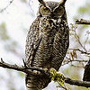 "Great Horned Owl © 2002 C. M. Neri  Snake River Canyon,ID GHOWID  <div class=""ss-paypal-button""><div class=""ss-paypal-add-to-cart-section""><div class=""ss-paypal-product-options""><h4>Mat Sizes</h4><ul><li><a href=""https://www.paypal.com/cgi-bin/webscr?cmd=_cart&amp;business=T77V5VKCW4K2U&amp;lc=US&amp;item_name=Great%20Horned%20Owl%20%C2%A9%202002%20C.%20M.%20Neri%20%20Snake%20River%20Canyon%2CID%20GHOWID&amp;item_number=http%3A%2F%2Fwww.nightflightimages.com%2FGalleries-1%2FTravels%2Fi-RwQhzWc&amp;button_subtype=products&amp;no_note=0&amp;cn=Add%20special%20instructions%20to%20the%20seller%3A&amp;no_shipping=2&amp;currency_code=USD&amp;weight_unit=lbs&amp;add=1&amp;bn=PP-ShopCartBF%3Abtn_cart_SM.gif%3ANonHosted&amp;on0=Mat%20Sizes&amp;option_select0=5%20x%207&amp;option_amount0=10.00&amp;option_select1=8%20x%2010&amp;option_amount1=18.00&amp;option_select2=11%20x%2014&amp;option_amount2=28.00&amp;option_select3=card&amp;option_amount3=4.00&amp;option_index=0&amp;charset=utf-8&amp;submit=&amp;os0=5%20x%207"" target=""paypal""><span>5 x 7 $11.00 USD</span><img src=""https://www.paypalobjects.com/en_US/i/btn/btn_cart_SM.gif""></a></li><li><a href=""https://www.paypal.com/cgi-bin/webscr?cmd=_cart&amp;business=T77V5VKCW4K2U&amp;lc=US&amp;item_name=Great%20Horned%20Owl%20%C2%A9%202002%20C.%20M.%20Neri%20%20Snake%20River%20Canyon%2CID%20GHOWID&amp;item_number=http%3A%2F%2Fwww.nightflightimages.com%2FGalleries-1%2FTravels%2Fi-RwQhzWc&amp;button_subtype=products&amp;no_note=0&amp;cn=Add%20special%20instructions%20to%20the%20seller%3A&amp;no_shipping=2&amp;currency_code=USD&amp;weight_unit=lbs&amp;add=1&amp;bn=PP-ShopCartBF%3Abtn_cart_SM.gif%3ANonHosted&amp;on0=Mat%20Sizes&amp;option_select0=5%20x%207&amp;option_amount0=10.00&amp;option_select1=8%20x%2010&amp;option_amount1=18.00&amp;option_select2=11%20x%2014&amp;option_amount2=28.00&amp;option_select3=card&amp;option_amount3=4.00&amp;option_index=0&amp;charset=utf-8&amp;submit=&amp;os0=8%20x%2010"" target=""paypal""><span>8 x 10 $19.00 USD</span><img src=""https://www.paypalobjects.com/en_US/i/btn/btn_cart_SM.gif""></a></li><li><a href=""https://www.paypal.com/cgi-bin/webscr?cmd=_cart&amp;business=T77V5VKCW4K2U&amp;lc=US&amp;item_name=Great%20Horned%20Owl%20%C2%A9%202002%20C.%20M.%20Neri%20%20Snake%20River%20Canyon%2CID%20GHOWID&amp;item_number=http%3A%2F%2Fwww.nightflightimages.com%2FGalleries-1%2FTravels%2Fi-RwQhzWc&amp;button_subtype=products&amp;no_note=0&amp;cn=Add%20special%20instructions%20to%20the%20seller%3A&amp;no_shipping=2&amp;currency_code=USD&amp;weight_unit=lbs&amp;add=1&amp;bn=PP-ShopCartBF%3Abtn_cart_SM.gif%3ANonHosted&amp;on0=Mat%20Sizes&amp;option_select0=5%20x%207&amp;option_amount0=10.00&amp;option_select1=8%20x%2010&amp;option_amount1=18.00&amp;option_select2=11%20x%2014&amp;option_amount2=28.00&amp;option_select3=card&amp;option_amount3=4.00&amp;option_index=0&amp;charset=utf-8&amp;submit=&amp;os0=11%20x%2014"" target=""paypal""><span>11 x 14 $29.00 USD</span><img src=""https://www.paypalobjects.com/en_US/i/btn/btn_cart_SM.gif""></a></li><li><a href=""https://www.paypal.com/cgi-bin/webscr?cmd=_cart&amp;business=T77V5VKCW4K2U&amp;lc=US&amp;item_name=Great%20Horned%20Owl%20%C2%A9%202002%20C.%20M.%20Neri%20%20Snake%20River%20Canyon%2CID%20GHOWID&amp;item_number=http%3A%2F%2Fwww.nightflightimages.com%2FGalleries-1%2FTravels%2Fi-RwQhzWc&amp;button_subtype=products&amp;no_note=0&amp;cn=Add%20special%20instructions%20to%20the%20seller%3A&amp;no_shipping=2&amp;currency_code=USD&amp;weight_unit=lbs&amp;add=1&amp;bn=PP-ShopCartBF%3Abtn_cart_SM.gif%3ANonHosted&amp;on0=Mat%20Sizes&amp;option_select0=5%20x%207&amp;option_amount0=10.00&amp;option_select1=8%20x%2010&amp;option_amount1=18.00&amp;option_select2=11%20x%2014&amp;option_amount2=28.00&amp;option_select3=card&amp;option_amount3=4.00&amp;option_index=0&amp;charset=utf-8&amp;submit=&amp;os0=card"" target=""paypal""><span>card $5.00 USD</span><img src=""https://www.paypalobjects.com/en_US/i/btn/btn_cart_SM.gif""></a></li></ul></div></div> <div class=""ss-paypal-view-cart-section""><a href=""https://www.paypal.com/cgi-bin/webscr?cmd=_cart&amp;business=T77V5VKCW4K2U&amp;display=1&amp;item_name=Great%20Horned%20Owl%20%C2%A9%202002%20C.%20M.%20Neri%20%20Snake%20River%20Canyon%2CID%20GHOWID&amp;item_number=http%3A%2F%2Fwww.nightflightimages.com%2FGalleries-1%2FTravels%2Fi-RwQhzWc&amp;charset=utf-8&amp;submit="" target=""paypal"" class=""ss-paypal-submit-button""><img src=""https://www.paypalobjects.com/en_US/i/btn/btn_viewcart_LG.gif""></a></div></div><div class=""ss-paypal-button-end""></div>"