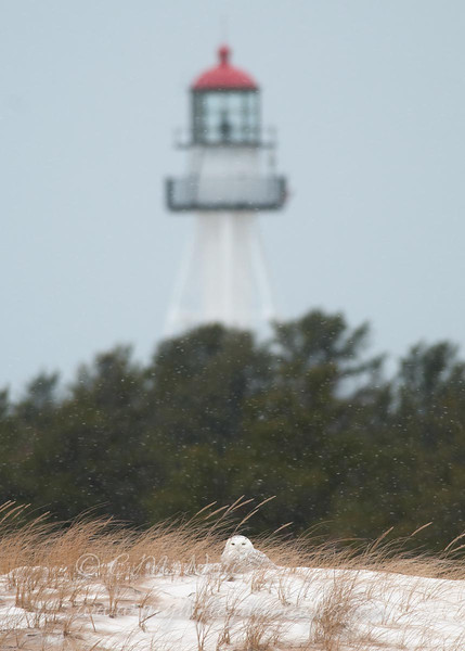 "Snowy Owl with lighthouse © 2013 C. M. Neri Whitefish Point, MI  SNOWLTB <div class=""ss-paypal-button""><div class=""ss-paypal-add-to-cart-section""><div class=""ss-paypal-product-options""><h4>Mat Sizes</h4><ul><li><a href=""https://www.paypal.com/cgi-bin/webscr?cmd=_cart&amp;business=T77V5VKCW4K2U&amp;lc=US&amp;item_name=Snowy%20Owl%20with%20lighthouse%20%C2%A9%202013%20C.%20M.%20Neri%20Whitefish%20Point%2C%20MI%20%20SNOWLTB&amp;item_number=http%3A%2F%2Fwww.nightflightimages.com%2FGalleries-1%2FOwls%2Fi-TJ5GB65&amp;button_subtype=products&amp;no_note=0&amp;cn=Add%20special%20instructions%20to%20the%20seller%3A&amp;no_shipping=2&amp;currency_code=USD&amp;weight_unit=lbs&amp;add=1&amp;bn=PP-ShopCartBF%3Abtn_cart_SM.gif%3ANonHosted&amp;on0=Mat%20Sizes&amp;option_select0=5%20x%207&amp;option_amount0=10.00&amp;option_select1=8%20x%2010&amp;option_amount1=18.00&amp;option_select2=11%20x%2014&amp;option_amount2=28.00&amp;option_select3=card&amp;option_amount3=4.00&amp;option_index=0&amp;charset=utf-8&amp;submit=&amp;os0=5%20x%207"" target=""paypal""><span>5 x 7 $11.00 USD</span><img src=""https://www.paypalobjects.com/en_US/i/btn/btn_cart_SM.gif""></a></li><li><a href=""https://www.paypal.com/cgi-bin/webscr?cmd=_cart&amp;business=T77V5VKCW4K2U&amp;lc=US&amp;item_name=Snowy%20Owl%20with%20lighthouse%20%C2%A9%202013%20C.%20M.%20Neri%20Whitefish%20Point%2C%20MI%20%20SNOWLTB&amp;item_number=http%3A%2F%2Fwww.nightflightimages.com%2FGalleries-1%2FOwls%2Fi-TJ5GB65&amp;button_subtype=products&amp;no_note=0&amp;cn=Add%20special%20instructions%20to%20the%20seller%3A&amp;no_shipping=2&amp;currency_code=USD&amp;weight_unit=lbs&amp;add=1&amp;bn=PP-ShopCartBF%3Abtn_cart_SM.gif%3ANonHosted&amp;on0=Mat%20Sizes&amp;option_select0=5%20x%207&amp;option_amount0=10.00&amp;option_select1=8%20x%2010&amp;option_amount1=18.00&amp;option_select2=11%20x%2014&amp;option_amount2=28.00&amp;option_select3=card&amp;option_amount3=4.00&amp;option_index=0&amp;charset=utf-8&amp;submit=&amp;os0=8%20x%2010"" target=""paypal""><span>8 x 10 $19.00 USD</span><img src=""https://www.paypalobjects.com/en_US/i/btn/btn_cart_SM.gif""></a></li><li><a href=""https://www.paypal.com/cgi-bin/webscr?cmd=_cart&amp;business=T77V5VKCW4K2U&amp;lc=US&amp;item_name=Snowy%20Owl%20with%20lighthouse%20%C2%A9%202013%20C.%20M.%20Neri%20Whitefish%20Point%2C%20MI%20%20SNOWLTB&amp;item_number=http%3A%2F%2Fwww.nightflightimages.com%2FGalleries-1%2FOwls%2Fi-TJ5GB65&amp;button_subtype=products&amp;no_note=0&amp;cn=Add%20special%20instructions%20to%20the%20seller%3A&amp;no_shipping=2&amp;currency_code=USD&amp;weight_unit=lbs&amp;add=1&amp;bn=PP-ShopCartBF%3Abtn_cart_SM.gif%3ANonHosted&amp;on0=Mat%20Sizes&amp;option_select0=5%20x%207&amp;option_amount0=10.00&amp;option_select1=8%20x%2010&amp;option_amount1=18.00&amp;option_select2=11%20x%2014&amp;option_amount2=28.00&amp;option_select3=card&amp;option_amount3=4.00&amp;option_index=0&amp;charset=utf-8&amp;submit=&amp;os0=11%20x%2014"" target=""paypal""><span>11 x 14 $29.00 USD</span><img src=""https://www.paypalobjects.com/en_US/i/btn/btn_cart_SM.gif""></a></li><li><a href=""https://www.paypal.com/cgi-bin/webscr?cmd=_cart&amp;business=T77V5VKCW4K2U&amp;lc=US&amp;item_name=Snowy%20Owl%20with%20lighthouse%20%C2%A9%202013%20C.%20M.%20Neri%20Whitefish%20Point%2C%20MI%20%20SNOWLTB&amp;item_number=http%3A%2F%2Fwww.nightflightimages.com%2FGalleries-1%2FOwls%2Fi-TJ5GB65&amp;button_subtype=products&amp;no_note=0&amp;cn=Add%20special%20instructions%20to%20the%20seller%3A&amp;no_shipping=2&amp;currency_code=USD&amp;weight_unit=lbs&amp;add=1&amp;bn=PP-ShopCartBF%3Abtn_cart_SM.gif%3ANonHosted&amp;on0=Mat%20Sizes&amp;option_select0=5%20x%207&amp;option_amount0=10.00&amp;option_select1=8%20x%2010&amp;option_amount1=18.00&amp;option_select2=11%20x%2014&amp;option_amount2=28.00&amp;option_select3=card&amp;option_amount3=4.00&amp;option_index=0&amp;charset=utf-8&amp;submit=&amp;os0=card"" target=""paypal""><span>card $5.00 USD</span><img src=""https://www.paypalobjects.com/en_US/i/btn/btn_cart_SM.gif""></a></li></ul></div></div> <div class=""ss-paypal-view-cart-section""><a href=""https://www.paypal.com/cgi-bin/webscr?cmd=_cart&amp;business=T77V5VKCW4K2U&amp;display=1&amp;item_name=Snowy%20Owl%20with%20lighthouse%20%C2%A9%202013%20C.%20M.%20Neri%20Whitefish%20Point%2C%20MI%20%20SNOWLTB&amp;item_number=http%3A%2F%2Fwww.nightflightimages.com%2FGalleries-1%2FOwls%2Fi-TJ5GB65&amp;charset=utf-8&amp;submit="" target=""paypal"" class=""ss-paypal-submit-button""><img src=""https://www.paypalobjects.com/en_US/i/btn/btn_viewcart_LG.gif""></a></div></div><div class=""ss-paypal-button-end""></div>"
