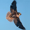 "Northern Hawk Owl  © 2013 C. M. Neri Chippewa County, MI NHOWFLGT  <div class=""ss-paypal-button""><div class=""ss-paypal-add-to-cart-section""><div class=""ss-paypal-product-options""><h4>Mat Sizes</h4><ul><li><a href=""https://www.paypal.com/cgi-bin/webscr?cmd=_cart&business=T77V5VKCW4K2U&lc=US&item_name=Northern%20Hawk%20Owl%20%20%C2%A9%202013%20C.%20M.%20Neri%20Chippewa%20County%2C%20MI%20NHOWFLGT&item_number=http%3A%2F%2Fwww.nightflightimages.com%2FGalleries-1%2FOwls%2Fi-VqqbCrM&button_subtype=products&no_note=0&cn=Add%20special%20instructions%20to%20the%20seller%3A&no_shipping=2&currency_code=USD&weight_unit=lbs&add=1&bn=PP-ShopCartBF%3Abtn_cart_SM.gif%3ANonHosted&on0=Mat%20Sizes&option_select0=5%20x%207&option_amount0=10.00&option_select1=8%20x%2010&option_amount1=18.00&option_select2=11%20x%2014&option_amount2=28.00&option_select3=card&option_amount3=4.00&option_index=0&charset=utf-8&submit=&os0=5%20x%207"" target=""paypal""><span>5 x 7 $11.00 USD</span><img src=""https://www.paypalobjects.com/en_US/i/btn/btn_cart_SM.gif""></a></li><li><a href=""https://www.paypal.com/cgi-bin/webscr?cmd=_cart&business=T77V5VKCW4K2U&lc=US&item_name=Northern%20Hawk%20Owl%20%20%C2%A9%202013%20C.%20M.%20Neri%20Chippewa%20County%2C%20MI%20NHOWFLGT&item_number=http%3A%2F%2Fwww.nightflightimages.com%2FGalleries-1%2FOwls%2Fi-VqqbCrM&button_subtype=products&no_note=0&cn=Add%20special%20instructions%20to%20the%20seller%3A&no_shipping=2&currency_code=USD&weight_unit=lbs&add=1&bn=PP-ShopCartBF%3Abtn_cart_SM.gif%3ANonHosted&on0=Mat%20Sizes&option_select0=5%20x%207&option_amount0=10.00&option_select1=8%20x%2010&option_amount1=18.00&option_select2=11%20x%2014&option_amount2=28.00&option_select3=card&option_amount3=4.00&option_index=0&charset=utf-8&submit=&os0=8%20x%2010"" target=""paypal""><span>8 x 10 $19.00 USD</span><img src=""https://www.paypalobjects.com/en_US/i/btn/btn_cart_SM.gif""></a></li><li><a href=""https://www.paypal.com/cgi-bin/webscr?cmd=_cart&business=T77V5VKCW4K2U&lc=US&item_name=Northern%20Hawk%20Owl%20%20%C2%A9%202013%20C.%20M.%20Neri%20Chippewa%20County%2C%20MI%20NHOWFLGT&item_number=http%3A%2F%2Fwww.nightflightimages.com%2FGalleries-1%2FOwls%2Fi-VqqbCrM&button_subtype=products&no_note=0&cn=Add%20special%20instructions%20to%20the%20seller%3A&no_shipping=2&currency_code=USD&weight_unit=lbs&add=1&bn=PP-ShopCartBF%3Abtn_cart_SM.gif%3ANonHosted&on0=Mat%20Sizes&option_select0=5%20x%207&option_amount0=10.00&option_select1=8%20x%2010&option_amount1=18.00&option_select2=11%20x%2014&option_amount2=28.00&option_select3=card&option_amount3=4.00&option_index=0&charset=utf-8&submit=&os0=11%20x%2014"" target=""paypal""><span>11 x 14 $29.00 USD</span><img src=""https://www.paypalobjects.com/en_US/i/btn/btn_cart_SM.gif""></a></li><li><a href=""https://www.paypal.com/cgi-bin/webscr?cmd=_cart&business=T77V5VKCW4K2U&lc=US&item_name=Northern%20Hawk%20Owl%20%20%C2%A9%202013%20C.%20M.%20Neri%20Chippewa%20County%2C%20MI%20NHOWFLGT&item_number=http%3A%2F%2Fwww.nightflightimages.com%2FGalleries-1%2FOwls%2Fi-VqqbCrM&button_subtype=products&no_note=0&cn=Add%20special%20instructions%20to%20the%20seller%3A&no_shipping=2&currency_code=USD&weight_unit=lbs&add=1&bn=PP-ShopCartBF%3Abtn_cart_SM.gif%3ANonHosted&on0=Mat%20Sizes&option_select0=5%20x%207&option_amount0=10.00&option_select1=8%20x%2010&option_amount1=18.00&option_select2=11%20x%2014&option_amount2=28.00&option_select3=card&option_amount3=4.00&option_index=0&charset=utf-8&submit=&os0=card"" target=""paypal""><span>card $5.00 USD</span><img src=""https://www.paypalobjects.com/en_US/i/btn/btn_cart_SM.gif""></a></li></ul></div></div> <div class=""ss-paypal-view-cart-section""><a href=""https://www.paypal.com/cgi-bin/webscr?cmd=_cart&business=T77V5VKCW4K2U&display=1&item_name=Northern%20Hawk%20Owl%20%20%C2%A9%202013%20C.%20M.%20Neri%20Chippewa%20County%2C%20MI%20NHOWFLGT&item_number=http%3A%2F%2Fwww.nightflightimages.com%2FGalleries-1%2FOwls%2Fi-VqqbCrM&charset=utf-8&submit="" target=""paypal"" class=""ss-paypal-submit-button""><img src=""https://www.paypalobjects.com/en_US/i/btn/btn_viewcart_LG.gif""></a></div></div><div class=""ss-paypal-button-end""></div>"