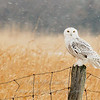 Snowy Owl on post © 2007 Nova Mackentley Amherst Island, ON