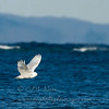 "Snowy Owl  © 2008 C. M. Neri Whitefish Point, MI SNOWYBAY  <div class=""ss-paypal-button""><div class=""ss-paypal-add-to-cart-section""><div class=""ss-paypal-product-options""><h4>Mat Sizes</h4><ul><li><a href=""https://www.paypal.com/cgi-bin/webscr?cmd=_cart&business=T77V5VKCW4K2U&lc=US&item_name=Snowy%20Owl%20%20%C2%A9%202008%20C.%20M.%20Neri%20Whitefish%20Point%2C%20MI%20SNOWYBAY&item_number=http%3A%2F%2Fwww.nightflightimages.com%2FGalleries-1%2FOwls%2Fi-XBfgCNG&button_subtype=products&no_note=0&cn=Add%20special%20instructions%20to%20the%20seller%3A&no_shipping=2&currency_code=USD&weight_unit=lbs&add=1&bn=PP-ShopCartBF%3Abtn_cart_SM.gif%3ANonHosted&on0=Mat%20Sizes&option_select0=5%20x%207&option_amount0=10.00&option_select1=8%20x%2010&option_amount1=18.00&option_select2=11%20x%2014&option_amount2=28.00&option_select3=card&option_amount3=4.00&option_index=0&charset=utf-8&submit=&os0=5%20x%207"" target=""paypal""><span>5 x 7 $11.00 USD</span><img src=""https://www.paypalobjects.com/en_US/i/btn/btn_cart_SM.gif""></a></li><li><a href=""https://www.paypal.com/cgi-bin/webscr?cmd=_cart&business=T77V5VKCW4K2U&lc=US&item_name=Snowy%20Owl%20%20%C2%A9%202008%20C.%20M.%20Neri%20Whitefish%20Point%2C%20MI%20SNOWYBAY&item_number=http%3A%2F%2Fwww.nightflightimages.com%2FGalleries-1%2FOwls%2Fi-XBfgCNG&button_subtype=products&no_note=0&cn=Add%20special%20instructions%20to%20the%20seller%3A&no_shipping=2&currency_code=USD&weight_unit=lbs&add=1&bn=PP-ShopCartBF%3Abtn_cart_SM.gif%3ANonHosted&on0=Mat%20Sizes&option_select0=5%20x%207&option_amount0=10.00&option_select1=8%20x%2010&option_amount1=18.00&option_select2=11%20x%2014&option_amount2=28.00&option_select3=card&option_amount3=4.00&option_index=0&charset=utf-8&submit=&os0=8%20x%2010"" target=""paypal""><span>8 x 10 $19.00 USD</span><img src=""https://www.paypalobjects.com/en_US/i/btn/btn_cart_SM.gif""></a></li><li><a href=""https://www.paypal.com/cgi-bin/webscr?cmd=_cart&business=T77V5VKCW4K2U&lc=US&item_name=Snowy%20Owl%20%20%C2%A9%202008%20C.%20M.%20Neri%20Whitefish%20Point%2C%20MI%20SNOWYBAY&item_number=http%3A%2F%2Fwww.nightflightimages.com%2FGalleries-1%2FOwls%2Fi-XBfgCNG&button_subtype=products&no_note=0&cn=Add%20special%20instructions%20to%20the%20seller%3A&no_shipping=2&currency_code=USD&weight_unit=lbs&add=1&bn=PP-ShopCartBF%3Abtn_cart_SM.gif%3ANonHosted&on0=Mat%20Sizes&option_select0=5%20x%207&option_amount0=10.00&option_select1=8%20x%2010&option_amount1=18.00&option_select2=11%20x%2014&option_amount2=28.00&option_select3=card&option_amount3=4.00&option_index=0&charset=utf-8&submit=&os0=11%20x%2014"" target=""paypal""><span>11 x 14 $29.00 USD</span><img src=""https://www.paypalobjects.com/en_US/i/btn/btn_cart_SM.gif""></a></li><li><a href=""https://www.paypal.com/cgi-bin/webscr?cmd=_cart&business=T77V5VKCW4K2U&lc=US&item_name=Snowy%20Owl%20%20%C2%A9%202008%20C.%20M.%20Neri%20Whitefish%20Point%2C%20MI%20SNOWYBAY&item_number=http%3A%2F%2Fwww.nightflightimages.com%2FGalleries-1%2FOwls%2Fi-XBfgCNG&button_subtype=products&no_note=0&cn=Add%20special%20instructions%20to%20the%20seller%3A&no_shipping=2&currency_code=USD&weight_unit=lbs&add=1&bn=PP-ShopCartBF%3Abtn_cart_SM.gif%3ANonHosted&on0=Mat%20Sizes&option_select0=5%20x%207&option_amount0=10.00&option_select1=8%20x%2010&option_amount1=18.00&option_select2=11%20x%2014&option_amount2=28.00&option_select3=card&option_amount3=4.00&option_index=0&charset=utf-8&submit=&os0=card"" target=""paypal""><span>card $5.00 USD</span><img src=""https://www.paypalobjects.com/en_US/i/btn/btn_cart_SM.gif""></a></li></ul></div></div> <div class=""ss-paypal-view-cart-section""><a href=""https://www.paypal.com/cgi-bin/webscr?cmd=_cart&business=T77V5VKCW4K2U&display=1&item_name=Snowy%20Owl%20%20%C2%A9%202008%20C.%20M.%20Neri%20Whitefish%20Point%2C%20MI%20SNOWYBAY&item_number=http%3A%2F%2Fwww.nightflightimages.com%2FGalleries-1%2FOwls%2Fi-XBfgCNG&charset=utf-8&submit="" target=""paypal"" class=""ss-paypal-submit-button""><img src=""https://www.paypalobjects.com/en_US/i/btn/btn_viewcart_LG.gif""></a></div></div><div class=""ss-paypal-button-end""></div>"