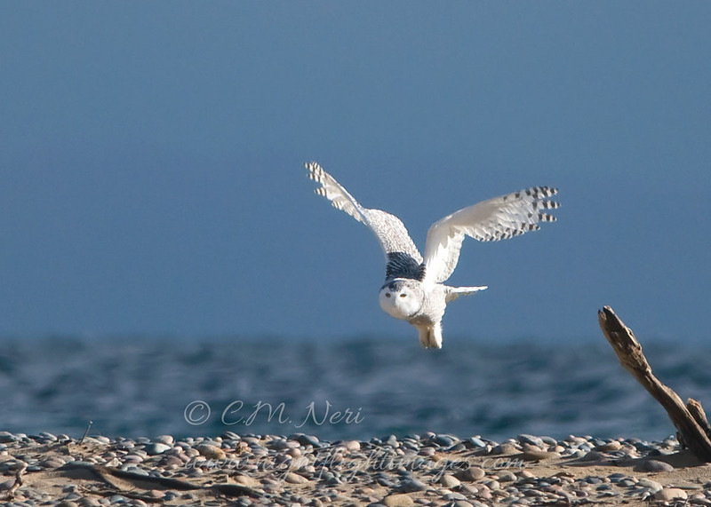 "Snowy Owl  © 2008 C. M. Neri  Whitefish Point, MI SNOWYFLGT  <div class=""ss-paypal-button""><div class=""ss-paypal-add-to-cart-section""><div class=""ss-paypal-product-options""><h4>Mat Sizes</h4><ul><li><a href=""https://www.paypal.com/cgi-bin/webscr?cmd=_cart&amp;business=T77V5VKCW4K2U&amp;lc=US&amp;item_name=Snowy%20Owl%20%20%C2%A9%202008%20C.%20M.%20Neri%20%20Whitefish%20Point%2C%20MI%20SNOWYFLGT&amp;item_number=http%3A%2F%2Fwww.nightflightimages.com%2FGalleries-1%2FOwls%2Fi-bCpVSz9&amp;button_subtype=products&amp;no_note=0&amp;cn=Add%20special%20instructions%20to%20the%20seller%3A&amp;no_shipping=2&amp;currency_code=USD&amp;weight_unit=lbs&amp;add=1&amp;bn=PP-ShopCartBF%3Abtn_cart_SM.gif%3ANonHosted&amp;on0=Mat%20Sizes&amp;option_select0=5%20x%207&amp;option_amount0=10.00&amp;option_select1=8%20x%2010&amp;option_amount1=18.00&amp;option_select2=11%20x%2014&amp;option_amount2=28.00&amp;option_select3=card&amp;option_amount3=4.00&amp;option_index=0&amp;charset=utf-8&amp;submit=&amp;os0=5%20x%207"" target=""paypal""><span>5 x 7 $11.00 USD</span><img src=""https://www.paypalobjects.com/en_US/i/btn/btn_cart_SM.gif""></a></li><li><a href=""https://www.paypal.com/cgi-bin/webscr?cmd=_cart&amp;business=T77V5VKCW4K2U&amp;lc=US&amp;item_name=Snowy%20Owl%20%20%C2%A9%202008%20C.%20M.%20Neri%20%20Whitefish%20Point%2C%20MI%20SNOWYFLGT&amp;item_number=http%3A%2F%2Fwww.nightflightimages.com%2FGalleries-1%2FOwls%2Fi-bCpVSz9&amp;button_subtype=products&amp;no_note=0&amp;cn=Add%20special%20instructions%20to%20the%20seller%3A&amp;no_shipping=2&amp;currency_code=USD&amp;weight_unit=lbs&amp;add=1&amp;bn=PP-ShopCartBF%3Abtn_cart_SM.gif%3ANonHosted&amp;on0=Mat%20Sizes&amp;option_select0=5%20x%207&amp;option_amount0=10.00&amp;option_select1=8%20x%2010&amp;option_amount1=18.00&amp;option_select2=11%20x%2014&amp;option_amount2=28.00&amp;option_select3=card&amp;option_amount3=4.00&amp;option_index=0&amp;charset=utf-8&amp;submit=&amp;os0=8%20x%2010"" target=""paypal""><span>8 x 10 $19.00 USD</span><img src=""https://www.paypalobjects.com/en_US/i/btn/btn_cart_SM.gif""></a></li><li><a href=""https://www.paypal.com/cgi-bin/webscr?cmd=_cart&amp;business=T77V5VKCW4K2U&amp;lc=US&amp;item_name=Snowy%20Owl%20%20%C2%A9%202008%20C.%20M.%20Neri%20%20Whitefish%20Point%2C%20MI%20SNOWYFLGT&amp;item_number=http%3A%2F%2Fwww.nightflightimages.com%2FGalleries-1%2FOwls%2Fi-bCpVSz9&amp;button_subtype=products&amp;no_note=0&amp;cn=Add%20special%20instructions%20to%20the%20seller%3A&amp;no_shipping=2&amp;currency_code=USD&amp;weight_unit=lbs&amp;add=1&amp;bn=PP-ShopCartBF%3Abtn_cart_SM.gif%3ANonHosted&amp;on0=Mat%20Sizes&amp;option_select0=5%20x%207&amp;option_amount0=10.00&amp;option_select1=8%20x%2010&amp;option_amount1=18.00&amp;option_select2=11%20x%2014&amp;option_amount2=28.00&amp;option_select3=card&amp;option_amount3=4.00&amp;option_index=0&amp;charset=utf-8&amp;submit=&amp;os0=11%20x%2014"" target=""paypal""><span>11 x 14 $29.00 USD</span><img src=""https://www.paypalobjects.com/en_US/i/btn/btn_cart_SM.gif""></a></li><li><a href=""https://www.paypal.com/cgi-bin/webscr?cmd=_cart&amp;business=T77V5VKCW4K2U&amp;lc=US&amp;item_name=Snowy%20Owl%20%20%C2%A9%202008%20C.%20M.%20Neri%20%20Whitefish%20Point%2C%20MI%20SNOWYFLGT&amp;item_number=http%3A%2F%2Fwww.nightflightimages.com%2FGalleries-1%2FOwls%2Fi-bCpVSz9&amp;button_subtype=products&amp;no_note=0&amp;cn=Add%20special%20instructions%20to%20the%20seller%3A&amp;no_shipping=2&amp;currency_code=USD&amp;weight_unit=lbs&amp;add=1&amp;bn=PP-ShopCartBF%3Abtn_cart_SM.gif%3ANonHosted&amp;on0=Mat%20Sizes&amp;option_select0=5%20x%207&amp;option_amount0=10.00&amp;option_select1=8%20x%2010&amp;option_amount1=18.00&amp;option_select2=11%20x%2014&amp;option_amount2=28.00&amp;option_select3=card&amp;option_amount3=4.00&amp;option_index=0&amp;charset=utf-8&amp;submit=&amp;os0=card"" target=""paypal""><span>card $5.00 USD</span><img src=""https://www.paypalobjects.com/en_US/i/btn/btn_cart_SM.gif""></a></li></ul></div></div> <div class=""ss-paypal-view-cart-section""><a href=""https://www.paypal.com/cgi-bin/webscr?cmd=_cart&amp;business=T77V5VKCW4K2U&amp;display=1&amp;item_name=Snowy%20Owl%20%20%C2%A9%202008%20C.%20M.%20Neri%20%20Whitefish%20Point%2C%20MI%20SNOWYFLGT&amp;item_number=http%3A%2F%2Fwww.nightflightimages.com%2FGalleries-1%2FOwls%2Fi-bCpVSz9&amp;charset=utf-8&amp;submit="" target=""paypal"" class=""ss-paypal-submit-button""><img src=""https://www.paypalobjects.com/en_US/i/btn/btn_viewcart_LG.gif""></a></div></div><div class=""ss-paypal-button-end""></div>"