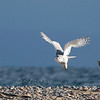 "Snowy Owl  © 2008 C. M. Neri  Whitefish Point, MI SNOWYFLGT  <div class=""ss-paypal-button""><div class=""ss-paypal-add-to-cart-section""><div class=""ss-paypal-product-options""><h4>Mat Sizes</h4><ul><li><a href=""https://www.paypal.com/cgi-bin/webscr?cmd=_cart&business=T77V5VKCW4K2U&lc=US&item_name=Snowy%20Owl%20%20%C2%A9%202008%20C.%20M.%20Neri%20%20Whitefish%20Point%2C%20MI%20SNOWYFLGT&item_number=http%3A%2F%2Fwww.nightflightimages.com%2FGalleries-1%2FOwls%2Fi-bCpVSz9&button_subtype=products&no_note=0&cn=Add%20special%20instructions%20to%20the%20seller%3A&no_shipping=2&currency_code=USD&weight_unit=lbs&add=1&bn=PP-ShopCartBF%3Abtn_cart_SM.gif%3ANonHosted&on0=Mat%20Sizes&option_select0=5%20x%207&option_amount0=10.00&option_select1=8%20x%2010&option_amount1=18.00&option_select2=11%20x%2014&option_amount2=28.00&option_select3=card&option_amount3=4.00&option_index=0&charset=utf-8&submit=&os0=5%20x%207"" target=""paypal""><span>5 x 7 $11.00 USD</span><img src=""https://www.paypalobjects.com/en_US/i/btn/btn_cart_SM.gif""></a></li><li><a href=""https://www.paypal.com/cgi-bin/webscr?cmd=_cart&business=T77V5VKCW4K2U&lc=US&item_name=Snowy%20Owl%20%20%C2%A9%202008%20C.%20M.%20Neri%20%20Whitefish%20Point%2C%20MI%20SNOWYFLGT&item_number=http%3A%2F%2Fwww.nightflightimages.com%2FGalleries-1%2FOwls%2Fi-bCpVSz9&button_subtype=products&no_note=0&cn=Add%20special%20instructions%20to%20the%20seller%3A&no_shipping=2&currency_code=USD&weight_unit=lbs&add=1&bn=PP-ShopCartBF%3Abtn_cart_SM.gif%3ANonHosted&on0=Mat%20Sizes&option_select0=5%20x%207&option_amount0=10.00&option_select1=8%20x%2010&option_amount1=18.00&option_select2=11%20x%2014&option_amount2=28.00&option_select3=card&option_amount3=4.00&option_index=0&charset=utf-8&submit=&os0=8%20x%2010"" target=""paypal""><span>8 x 10 $19.00 USD</span><img src=""https://www.paypalobjects.com/en_US/i/btn/btn_cart_SM.gif""></a></li><li><a href=""https://www.paypal.com/cgi-bin/webscr?cmd=_cart&business=T77V5VKCW4K2U&lc=US&item_name=Snowy%20Owl%20%20%C2%A9%202008%20C.%20M.%20Neri%20%20Whitefish%20Point%2C%20MI%20SNOWYFLGT&item_number=http%3A%2F%2Fwww.nightflightimages.com%2FGalleries-1%2FOwls%2Fi-bCpVSz9&button_subtype=products&no_note=0&cn=Add%20special%20instructions%20to%20the%20seller%3A&no_shipping=2&currency_code=USD&weight_unit=lbs&add=1&bn=PP-ShopCartBF%3Abtn_cart_SM.gif%3ANonHosted&on0=Mat%20Sizes&option_select0=5%20x%207&option_amount0=10.00&option_select1=8%20x%2010&option_amount1=18.00&option_select2=11%20x%2014&option_amount2=28.00&option_select3=card&option_amount3=4.00&option_index=0&charset=utf-8&submit=&os0=11%20x%2014"" target=""paypal""><span>11 x 14 $29.00 USD</span><img src=""https://www.paypalobjects.com/en_US/i/btn/btn_cart_SM.gif""></a></li><li><a href=""https://www.paypal.com/cgi-bin/webscr?cmd=_cart&business=T77V5VKCW4K2U&lc=US&item_name=Snowy%20Owl%20%20%C2%A9%202008%20C.%20M.%20Neri%20%20Whitefish%20Point%2C%20MI%20SNOWYFLGT&item_number=http%3A%2F%2Fwww.nightflightimages.com%2FGalleries-1%2FOwls%2Fi-bCpVSz9&button_subtype=products&no_note=0&cn=Add%20special%20instructions%20to%20the%20seller%3A&no_shipping=2&currency_code=USD&weight_unit=lbs&add=1&bn=PP-ShopCartBF%3Abtn_cart_SM.gif%3ANonHosted&on0=Mat%20Sizes&option_select0=5%20x%207&option_amount0=10.00&option_select1=8%20x%2010&option_amount1=18.00&option_select2=11%20x%2014&option_amount2=28.00&option_select3=card&option_amount3=4.00&option_index=0&charset=utf-8&submit=&os0=card"" target=""paypal""><span>card $5.00 USD</span><img src=""https://www.paypalobjects.com/en_US/i/btn/btn_cart_SM.gif""></a></li></ul></div></div> <div class=""ss-paypal-view-cart-section""><a href=""https://www.paypal.com/cgi-bin/webscr?cmd=_cart&business=T77V5VKCW4K2U&display=1&item_name=Snowy%20Owl%20%20%C2%A9%202008%20C.%20M.%20Neri%20%20Whitefish%20Point%2C%20MI%20SNOWYFLGT&item_number=http%3A%2F%2Fwww.nightflightimages.com%2FGalleries-1%2FOwls%2Fi-bCpVSz9&charset=utf-8&submit="" target=""paypal"" class=""ss-paypal-submit-button""><img src=""https://www.paypalobjects.com/en_US/i/btn/btn_viewcart_LG.gif""></a></div></div><div class=""ss-paypal-button-end""></div>"