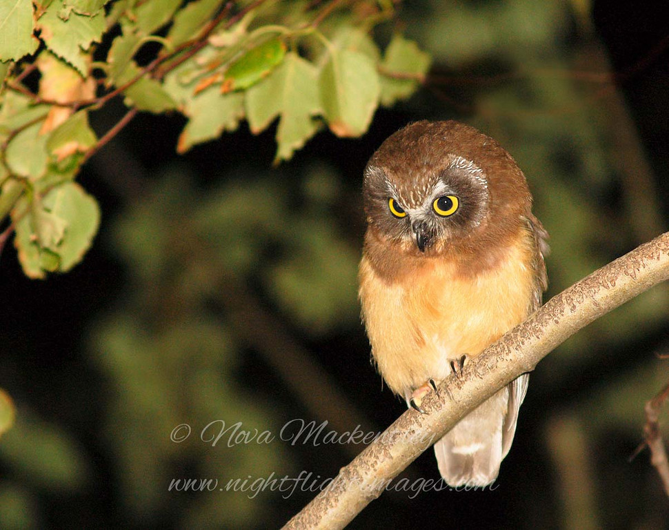 """Juvenile Saw-whet Owl © 2007 Nova Mackentley Whitefish Point, MI JSB  <div class=""""ss-paypal-button""""><div class=""""ss-paypal-add-to-cart-section""""><div class=""""ss-paypal-product-options""""><h4>Mat Sizes</h4><ul><li><a href=""""https://www.paypal.com/cgi-bin/webscr?cmd=_cart&business=T77V5VKCW4K2U&lc=US&item_name=Juvenile%20Saw-whet%20Owl%20%C2%A9%202007%20Nova%20Mackentley%20Whitefish%20Point%2C%20MI%20JSB&item_number=http%3A%2F%2Fwww.nightflightimages.com%2FGalleries-1%2FUpper-Peninsula-of-MI%2Fi-bCsT79M&button_subtype=products&no_note=0&cn=Add%20special%20instructions%20to%20the%20seller%3A&no_shipping=2&currency_code=USD&weight_unit=lbs&add=1&bn=PP-ShopCartBF%3Abtn_cart_SM.gif%3ANonHosted&on0=Mat%20Sizes&option_select0=5%20x%207&option_amount0=10.00&option_select1=8%20x%2010&option_amount1=18.00&option_select2=11%20x%2014&option_amount2=28.00&option_select3=card&option_amount3=4.00&option_index=0&charset=utf-8&submit=&os0=5%20x%207"""" target=""""paypal""""><span>5 x 7 $11.00 USD</span><img src=""""https://www.paypalobjects.com/en_US/i/btn/btn_cart_SM.gif""""></a></li><li><a href=""""https://www.paypal.com/cgi-bin/webscr?cmd=_cart&business=T77V5VKCW4K2U&lc=US&item_name=Juvenile%20Saw-whet%20Owl%20%C2%A9%202007%20Nova%20Mackentley%20Whitefish%20Point%2C%20MI%20JSB&item_number=http%3A%2F%2Fwww.nightflightimages.com%2FGalleries-1%2FUpper-Peninsula-of-MI%2Fi-bCsT79M&button_subtype=products&no_note=0&cn=Add%20special%20instructions%20to%20the%20seller%3A&no_shipping=2&currency_code=USD&weight_unit=lbs&add=1&bn=PP-ShopCartBF%3Abtn_cart_SM.gif%3ANonHosted&on0=Mat%20Sizes&option_select0=5%20x%207&option_amount0=10.00&option_select1=8%20x%2010&option_amount1=18.00&option_select2=11%20x%2014&option_amount2=28.00&option_select3=card&option_amount3=4.00&option_index=0&charset=utf-8&submit=&os0=8%20x%2010"""" target=""""paypal""""><span>8 x 10 $19.00 USD</span><img src=""""https://www.paypalobjects.com/en_US/i/btn/btn_cart_SM.gif""""></a></li><li><a href=""""https://www.paypal.com/cgi-bin/webscr?cmd=_cart&business=T77V5V"""