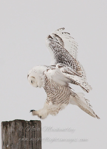 "Snowy Owl landing on post © 2007 Nova Mackentley Amherst Island, ON SLA  <div class=""ss-paypal-button""><div class=""ss-paypal-add-to-cart-section""><div class=""ss-paypal-product-options""><h4>Mat Sizes</h4><ul><li><a href=""https://www.paypal.com/cgi-bin/webscr?cmd=_cart&business=T77V5VKCW4K2U&lc=US&item_name=Snowy%20Owl%20landing%20on%20post%20%C2%A9%202007%20Nova%20Mackentley%20Amherst%20Island%2C%20ON%20SLA&item_number=http%3A%2F%2Fwww.nightflightimages.com%2FGalleries-1%2FOwls%2Fi-bNRPFKC&button_subtype=products&no_note=0&cn=Add%20special%20instructions%20to%20the%20seller%3A&no_shipping=2&currency_code=USD&weight_unit=lbs&add=1&bn=PP-ShopCartBF%3Abtn_cart_SM.gif%3ANonHosted&on0=Mat%20Sizes&option_select0=5%20x%207&option_amount0=10.00&option_select1=8%20x%2010&option_amount1=18.00&option_select2=11%20x%2014&option_amount2=28.00&option_select3=card&option_amount3=4.00&option_index=0&charset=utf-8&submit=&os0=5%20x%207"" target=""paypal""><span>5 x 7 $11.00 USD</span><img src=""https://www.paypalobjects.com/en_US/i/btn/btn_cart_SM.gif""></a></li><li><a href=""https://www.paypal.com/cgi-bin/webscr?cmd=_cart&business=T77V5VKCW4K2U&lc=US&item_name=Snowy%20Owl%20landing%20on%20post%20%C2%A9%202007%20Nova%20Mackentley%20Amherst%20Island%2C%20ON%20SLA&item_number=http%3A%2F%2Fwww.nightflightimages.com%2FGalleries-1%2FOwls%2Fi-bNRPFKC&button_subtype=products&no_note=0&cn=Add%20special%20instructions%20to%20the%20seller%3A&no_shipping=2&currency_code=USD&weight_unit=lbs&add=1&bn=PP-ShopCartBF%3Abtn_cart_SM.gif%3ANonHosted&on0=Mat%20Sizes&option_select0=5%20x%207&option_amount0=10.00&option_select1=8%20x%2010&option_amount1=18.00&option_select2=11%20x%2014&option_amount2=28.00&option_select3=card&option_amount3=4.00&option_index=0&charset=utf-8&submit=&os0=8%20x%2010"" target=""paypal""><span>8 x 10 $19.00 USD</span><img src=""https://www.paypalobjects.com/en_US/i/btn/btn_cart_SM.gif""></a></li><li><a href=""https://www.paypal.com/cgi-bin/webscr?cmd=_cart&business=T77V5VKCW4K2U&lc=US&item_name=Snowy%20Owl%20landing%20on%20post%20%C2%A9%202007%20Nova%20Mackentley%20Amherst%20Island%2C%20ON%20SLA&item_number=http%3A%2F%2Fwww.nightflightimages.com%2FGalleries-1%2FOwls%2Fi-bNRPFKC&button_subtype=products&no_note=0&cn=Add%20special%20instructions%20to%20the%20seller%3A&no_shipping=2&currency_code=USD&weight_unit=lbs&add=1&bn=PP-ShopCartBF%3Abtn_cart_SM.gif%3ANonHosted&on0=Mat%20Sizes&option_select0=5%20x%207&option_amount0=10.00&option_select1=8%20x%2010&option_amount1=18.00&option_select2=11%20x%2014&option_amount2=28.00&option_select3=card&option_amount3=4.00&option_index=0&charset=utf-8&submit=&os0=11%20x%2014"" target=""paypal""><span>11 x 14 $29.00 USD</span><img src=""https://www.paypalobjects.com/en_US/i/btn/btn_cart_SM.gif""></a></li><li><a href=""https://www.paypal.com/cgi-bin/webscr?cmd=_cart&business=T77V5VKCW4K2U&lc=US&item_name=Snowy%20Owl%20landing%20on%20post%20%C2%A9%202007%20Nova%20Mackentley%20Amherst%20Island%2C%20ON%20SLA&item_number=http%3A%2F%2Fwww.nightflightimages.com%2FGalleries-1%2FOwls%2Fi-bNRPFKC&button_subtype=products&no_note=0&cn=Add%20special%20instructions%20to%20the%20seller%3A&no_shipping=2&currency_code=USD&weight_unit=lbs&add=1&bn=PP-ShopCartBF%3Abtn_cart_SM.gif%3ANonHosted&on0=Mat%20Sizes&option_select0=5%20x%207&option_amount0=10.00&option_select1=8%20x%2010&option_amount1=18.00&option_select2=11%20x%2014&option_amount2=28.00&option_select3=card&option_amount3=4.00&option_index=0&charset=utf-8&submit=&os0=card"" target=""paypal""><span>card $5.00 USD</span><img src=""https://www.paypalobjects.com/en_US/i/btn/btn_cart_SM.gif""></a></li></ul></div></div> <div class=""ss-paypal-view-cart-section""><a href=""https://www.paypal.com/cgi-bin/webscr?cmd=_cart&business=T77V5VKCW4K2U&display=1&item_name=Snowy%20Owl%20landing%20on%20post%20%C2%A9%202007%20Nova%20Mackentley%20Amherst%20Island%2C%20ON%20SLA&item_number=http%3A%2F%2Fwww.nightflightimages.com%2FGalleries-1%2FOwls%2Fi-bNRPFKC&charset=utf-8&submit="" target=""paypal"" class=""ss-paypal-submit-button""><img src=""https://www.paypalobjects.com/en_US/i/btn/btn_viewcart_LG.gif""></a></div></div><div class=""ss-paypal-button-end""></div>"