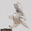 "Snowy Owl landing on post © 2007 Nova Mackentley Amherst Island, ON SLA  <div class=""ss-paypal-button""><div class=""ss-paypal-add-to-cart-section""><div class=""ss-paypal-product-options""><h4>Mat Sizes</h4><ul><li><a href=""https://www.paypal.com/cgi-bin/webscr?cmd=_cart&amp;business=T77V5VKCW4K2U&amp;lc=US&amp;item_name=Snowy%20Owl%20landing%20on%20post%20%C2%A9%202007%20Nova%20Mackentley%20Amherst%20Island%2C%20ON%20SLA&amp;item_number=http%3A%2F%2Fwww.nightflightimages.com%2FGalleries-1%2FOwls%2Fi-bNRPFKC&amp;button_subtype=products&amp;no_note=0&amp;cn=Add%20special%20instructions%20to%20the%20seller%3A&amp;no_shipping=2&amp;currency_code=USD&amp;weight_unit=lbs&amp;add=1&amp;bn=PP-ShopCartBF%3Abtn_cart_SM.gif%3ANonHosted&amp;on0=Mat%20Sizes&amp;option_select0=5%20x%207&amp;option_amount0=10.00&amp;option_select1=8%20x%2010&amp;option_amount1=18.00&amp;option_select2=11%20x%2014&amp;option_amount2=28.00&amp;option_select3=card&amp;option_amount3=4.00&amp;option_index=0&amp;charset=utf-8&amp;submit=&amp;os0=5%20x%207"" target=""paypal""><span>5 x 7 $11.00 USD</span><img src=""https://www.paypalobjects.com/en_US/i/btn/btn_cart_SM.gif""></a></li><li><a href=""https://www.paypal.com/cgi-bin/webscr?cmd=_cart&amp;business=T77V5VKCW4K2U&amp;lc=US&amp;item_name=Snowy%20Owl%20landing%20on%20post%20%C2%A9%202007%20Nova%20Mackentley%20Amherst%20Island%2C%20ON%20SLA&amp;item_number=http%3A%2F%2Fwww.nightflightimages.com%2FGalleries-1%2FOwls%2Fi-bNRPFKC&amp;button_subtype=products&amp;no_note=0&amp;cn=Add%20special%20instructions%20to%20the%20seller%3A&amp;no_shipping=2&amp;currency_code=USD&amp;weight_unit=lbs&amp;add=1&amp;bn=PP-ShopCartBF%3Abtn_cart_SM.gif%3ANonHosted&amp;on0=Mat%20Sizes&amp;option_select0=5%20x%207&amp;option_amount0=10.00&amp;option_select1=8%20x%2010&amp;option_amount1=18.00&amp;option_select2=11%20x%2014&amp;option_amount2=28.00&amp;option_select3=card&amp;option_amount3=4.00&amp;option_index=0&amp;charset=utf-8&amp;submit=&amp;os0=8%20x%2010"" target=""paypal""><span>8 x 10 $19.00 USD</span><img src=""https://www.paypalobjects.com/en_US/i/btn/btn_cart_SM.gif""></a></li><li><a href=""https://www.paypal.com/cgi-bin/webscr?cmd=_cart&amp;business=T77V5VKCW4K2U&amp;lc=US&amp;item_name=Snowy%20Owl%20landing%20on%20post%20%C2%A9%202007%20Nova%20Mackentley%20Amherst%20Island%2C%20ON%20SLA&amp;item_number=http%3A%2F%2Fwww.nightflightimages.com%2FGalleries-1%2FOwls%2Fi-bNRPFKC&amp;button_subtype=products&amp;no_note=0&amp;cn=Add%20special%20instructions%20to%20the%20seller%3A&amp;no_shipping=2&amp;currency_code=USD&amp;weight_unit=lbs&amp;add=1&amp;bn=PP-ShopCartBF%3Abtn_cart_SM.gif%3ANonHosted&amp;on0=Mat%20Sizes&amp;option_select0=5%20x%207&amp;option_amount0=10.00&amp;option_select1=8%20x%2010&amp;option_amount1=18.00&amp;option_select2=11%20x%2014&amp;option_amount2=28.00&amp;option_select3=card&amp;option_amount3=4.00&amp;option_index=0&amp;charset=utf-8&amp;submit=&amp;os0=11%20x%2014"" target=""paypal""><span>11 x 14 $29.00 USD</span><img src=""https://www.paypalobjects.com/en_US/i/btn/btn_cart_SM.gif""></a></li><li><a href=""https://www.paypal.com/cgi-bin/webscr?cmd=_cart&amp;business=T77V5VKCW4K2U&amp;lc=US&amp;item_name=Snowy%20Owl%20landing%20on%20post%20%C2%A9%202007%20Nova%20Mackentley%20Amherst%20Island%2C%20ON%20SLA&amp;item_number=http%3A%2F%2Fwww.nightflightimages.com%2FGalleries-1%2FOwls%2Fi-bNRPFKC&amp;button_subtype=products&amp;no_note=0&amp;cn=Add%20special%20instructions%20to%20the%20seller%3A&amp;no_shipping=2&amp;currency_code=USD&amp;weight_unit=lbs&amp;add=1&amp;bn=PP-ShopCartBF%3Abtn_cart_SM.gif%3ANonHosted&amp;on0=Mat%20Sizes&amp;option_select0=5%20x%207&amp;option_amount0=10.00&amp;option_select1=8%20x%2010&amp;option_amount1=18.00&amp;option_select2=11%20x%2014&amp;option_amount2=28.00&amp;option_select3=card&amp;option_amount3=4.00&amp;option_index=0&amp;charset=utf-8&amp;submit=&amp;os0=card"" target=""paypal""><span>card $5.00 USD</span><img src=""https://www.paypalobjects.com/en_US/i/btn/btn_cart_SM.gif""></a></li></ul></div></div> <div class=""ss-paypal-view-cart-section""><a href=""https://www.paypal.com/cgi-bin/webscr?cmd=_cart&amp;business=T77V5VKCW4K2U&amp;display=1&amp;item_name=Snowy%20Owl%20landing%20on%20post%20%C2%A9%202007%20Nova%20Mackentley%20Amherst%20Island%2C%20ON%20SLA&amp;item_number=http%3A%2F%2Fwww.nightflightimages.com%2FGalleries-1%2FOwls%2Fi-bNRPFKC&amp;charset=utf-8&amp;submit="" target=""paypal"" class=""ss-paypal-submit-button""><img src=""https://www.paypalobjects.com/en_US/i/btn/btn_viewcart_LG.gif""></a></div></div><div class=""ss-paypal-button-end""></div>"