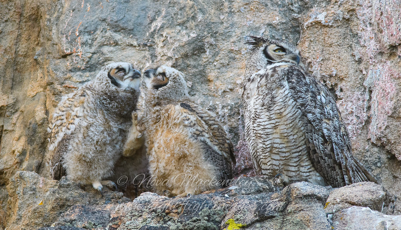 "Great Horned Owl family © 2016 Nova Mackentley Estes Park, CO GHS  <div class=""ss-paypal-button""><div class=""ss-paypal-add-to-cart-section""><div class=""ss-paypal-product-options""><h4>Mat Sizes</h4><ul><li><a href=""https://www.paypal.com/cgi-bin/webscr?cmd=_cart&business=T77V5VKCW4K2U&lc=US&item_name=Great%20Horned%20Owl%20family%20%C2%A9%202016%20Nova%20Mackentley%20Estes%20Park%2C%20CO%20GHS&item_number=http%3A%2F%2Fwww.nightflightimages.com%2FGalleries-1%2FNew%2Fi-cN8wRS8&button_subtype=products&no_note=0&cn=Add%20special%20instructions%20to%20the%20seller%3A&no_shipping=2&currency_code=USD&weight_unit=lbs&add=1&bn=PP-ShopCartBF%3Abtn_cart_SM.gif%3ANonHosted&on0=Mat%20Sizes&option_select0=5%20x%207&option_amount0=10.00&option_select1=8%20x%2010&option_amount1=18.00&option_select2=11%20x%2014&option_amount2=28.00&option_select3=card&option_amount3=4.00&option_index=0&charset=utf-8&submit=&os0=5%20x%207"" target=""paypal""><span>5 x 7 $11.00 USD</span><img src=""https://www.paypalobjects.com/en_US/i/btn/btn_cart_SM.gif""></a></li><li><a href=""https://www.paypal.com/cgi-bin/webscr?cmd=_cart&business=T77V5VKCW4K2U&lc=US&item_name=Great%20Horned%20Owl%20family%20%C2%A9%202016%20Nova%20Mackentley%20Estes%20Park%2C%20CO%20GHS&item_number=http%3A%2F%2Fwww.nightflightimages.com%2FGalleries-1%2FNew%2Fi-cN8wRS8&button_subtype=products&no_note=0&cn=Add%20special%20instructions%20to%20the%20seller%3A&no_shipping=2&currency_code=USD&weight_unit=lbs&add=1&bn=PP-ShopCartBF%3Abtn_cart_SM.gif%3ANonHosted&on0=Mat%20Sizes&option_select0=5%20x%207&option_amount0=10.00&option_select1=8%20x%2010&option_amount1=18.00&option_select2=11%20x%2014&option_amount2=28.00&option_select3=card&option_amount3=4.00&option_index=0&charset=utf-8&submit=&os0=8%20x%2010"" target=""paypal""><span>8 x 10 $19.00 USD</span><img src=""https://www.paypalobjects.com/en_US/i/btn/btn_cart_SM.gif""></a></li><li><a href=""https://www.paypal.com/cgi-bin/webscr?cmd=_cart&business=T77V5VKCW4K2U&lc=US&item_name=Great%20Horned%20Owl%20family%20%C2%A9%202016%20Nova%20Mackentley%20Estes%20Park%2C%20CO%20GHS&item_number=http%3A%2F%2Fwww.nightflightimages.com%2FGalleries-1%2FNew%2Fi-cN8wRS8&button_subtype=products&no_note=0&cn=Add%20special%20instructions%20to%20the%20seller%3A&no_shipping=2&currency_code=USD&weight_unit=lbs&add=1&bn=PP-ShopCartBF%3Abtn_cart_SM.gif%3ANonHosted&on0=Mat%20Sizes&option_select0=5%20x%207&option_amount0=10.00&option_select1=8%20x%2010&option_amount1=18.00&option_select2=11%20x%2014&option_amount2=28.00&option_select3=card&option_amount3=4.00&option_index=0&charset=utf-8&submit=&os0=11%20x%2014"" target=""paypal""><span>11 x 14 $29.00 USD</span><img src=""https://www.paypalobjects.com/en_US/i/btn/btn_cart_SM.gif""></a></li><li><a href=""https://www.paypal.com/cgi-bin/webscr?cmd=_cart&business=T77V5VKCW4K2U&lc=US&item_name=Great%20Horned%20Owl%20family%20%C2%A9%202016%20Nova%20Mackentley%20Estes%20Park%2C%20CO%20GHS&item_number=http%3A%2F%2Fwww.nightflightimages.com%2FGalleries-1%2FNew%2Fi-cN8wRS8&button_subtype=products&no_note=0&cn=Add%20special%20instructions%20to%20the%20seller%3A&no_shipping=2&currency_code=USD&weight_unit=lbs&add=1&bn=PP-ShopCartBF%3Abtn_cart_SM.gif%3ANonHosted&on0=Mat%20Sizes&option_select0=5%20x%207&option_amount0=10.00&option_select1=8%20x%2010&option_amount1=18.00&option_select2=11%20x%2014&option_amount2=28.00&option_select3=card&option_amount3=4.00&option_index=0&charset=utf-8&submit=&os0=card"" target=""paypal""><span>card $5.00 USD</span><img src=""https://www.paypalobjects.com/en_US/i/btn/btn_cart_SM.gif""></a></li></ul></div></div> <div class=""ss-paypal-view-cart-section""><a href=""https://www.paypal.com/cgi-bin/webscr?cmd=_cart&business=T77V5VKCW4K2U&display=1&item_name=Great%20Horned%20Owl%20family%20%C2%A9%202016%20Nova%20Mackentley%20Estes%20Park%2C%20CO%20GHS&item_number=http%3A%2F%2Fwww.nightflightimages.com%2FGalleries-1%2FNew%2Fi-cN8wRS8&charset=utf-8&submit="" target=""paypal"" class=""ss-paypal-submit-button""><img src=""https://www.paypalobjects.com/en_US/i/btn/btn_viewcart_LG.gif""></a></div></div><div class=""ss-paypal-button-end""></div>"