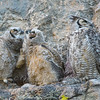 "Great Horned Owl family © 2016 Nova Mackentley Estes Park, CO GHS  <div class=""ss-paypal-button""><div class=""ss-paypal-add-to-cart-section""><div class=""ss-paypal-product-options""><h4>Mat Sizes</h4><ul><li><a href=""https://www.paypal.com/cgi-bin/webscr?cmd=_cart&amp;business=T77V5VKCW4K2U&amp;lc=US&amp;item_name=Great%20Horned%20Owl%20family%20%C2%A9%202016%20Nova%20Mackentley%20Estes%20Park%2C%20CO%20GHS&amp;item_number=http%3A%2F%2Fwww.nightflightimages.com%2FGalleries-1%2FNew%2Fi-cN8wRS8&amp;button_subtype=products&amp;no_note=0&amp;cn=Add%20special%20instructions%20to%20the%20seller%3A&amp;no_shipping=2&amp;currency_code=USD&amp;weight_unit=lbs&amp;add=1&amp;bn=PP-ShopCartBF%3Abtn_cart_SM.gif%3ANonHosted&amp;on0=Mat%20Sizes&amp;option_select0=5%20x%207&amp;option_amount0=10.00&amp;option_select1=8%20x%2010&amp;option_amount1=18.00&amp;option_select2=11%20x%2014&amp;option_amount2=28.00&amp;option_select3=card&amp;option_amount3=4.00&amp;option_index=0&amp;charset=utf-8&amp;submit=&amp;os0=5%20x%207"" target=""paypal""><span>5 x 7 $11.00 USD</span><img src=""https://www.paypalobjects.com/en_US/i/btn/btn_cart_SM.gif""></a></li><li><a href=""https://www.paypal.com/cgi-bin/webscr?cmd=_cart&amp;business=T77V5VKCW4K2U&amp;lc=US&amp;item_name=Great%20Horned%20Owl%20family%20%C2%A9%202016%20Nova%20Mackentley%20Estes%20Park%2C%20CO%20GHS&amp;item_number=http%3A%2F%2Fwww.nightflightimages.com%2FGalleries-1%2FNew%2Fi-cN8wRS8&amp;button_subtype=products&amp;no_note=0&amp;cn=Add%20special%20instructions%20to%20the%20seller%3A&amp;no_shipping=2&amp;currency_code=USD&amp;weight_unit=lbs&amp;add=1&amp;bn=PP-ShopCartBF%3Abtn_cart_SM.gif%3ANonHosted&amp;on0=Mat%20Sizes&amp;option_select0=5%20x%207&amp;option_amount0=10.00&amp;option_select1=8%20x%2010&amp;option_amount1=18.00&amp;option_select2=11%20x%2014&amp;option_amount2=28.00&amp;option_select3=card&amp;option_amount3=4.00&amp;option_index=0&amp;charset=utf-8&amp;submit=&amp;os0=8%20x%2010"" target=""paypal""><span>8 x 10 $19.00 USD</span><img src=""https://www.paypalobjects.com/en_US/i/btn/btn_cart_SM.gif""></a></li><li><a href=""https://www.paypal.com/cgi-bin/webscr?cmd=_cart&amp;business=T77V5VKCW4K2U&amp;lc=US&amp;item_name=Great%20Horned%20Owl%20family%20%C2%A9%202016%20Nova%20Mackentley%20Estes%20Park%2C%20CO%20GHS&amp;item_number=http%3A%2F%2Fwww.nightflightimages.com%2FGalleries-1%2FNew%2Fi-cN8wRS8&amp;button_subtype=products&amp;no_note=0&amp;cn=Add%20special%20instructions%20to%20the%20seller%3A&amp;no_shipping=2&amp;currency_code=USD&amp;weight_unit=lbs&amp;add=1&amp;bn=PP-ShopCartBF%3Abtn_cart_SM.gif%3ANonHosted&amp;on0=Mat%20Sizes&amp;option_select0=5%20x%207&amp;option_amount0=10.00&amp;option_select1=8%20x%2010&amp;option_amount1=18.00&amp;option_select2=11%20x%2014&amp;option_amount2=28.00&amp;option_select3=card&amp;option_amount3=4.00&amp;option_index=0&amp;charset=utf-8&amp;submit=&amp;os0=11%20x%2014"" target=""paypal""><span>11 x 14 $29.00 USD</span><img src=""https://www.paypalobjects.com/en_US/i/btn/btn_cart_SM.gif""></a></li><li><a href=""https://www.paypal.com/cgi-bin/webscr?cmd=_cart&amp;business=T77V5VKCW4K2U&amp;lc=US&amp;item_name=Great%20Horned%20Owl%20family%20%C2%A9%202016%20Nova%20Mackentley%20Estes%20Park%2C%20CO%20GHS&amp;item_number=http%3A%2F%2Fwww.nightflightimages.com%2FGalleries-1%2FNew%2Fi-cN8wRS8&amp;button_subtype=products&amp;no_note=0&amp;cn=Add%20special%20instructions%20to%20the%20seller%3A&amp;no_shipping=2&amp;currency_code=USD&amp;weight_unit=lbs&amp;add=1&amp;bn=PP-ShopCartBF%3Abtn_cart_SM.gif%3ANonHosted&amp;on0=Mat%20Sizes&amp;option_select0=5%20x%207&amp;option_amount0=10.00&amp;option_select1=8%20x%2010&amp;option_amount1=18.00&amp;option_select2=11%20x%2014&amp;option_amount2=28.00&amp;option_select3=card&amp;option_amount3=4.00&amp;option_index=0&amp;charset=utf-8&amp;submit=&amp;os0=card"" target=""paypal""><span>card $5.00 USD</span><img src=""https://www.paypalobjects.com/en_US/i/btn/btn_cart_SM.gif""></a></li></ul></div></div> <div class=""ss-paypal-view-cart-section""><a href=""https://www.paypal.com/cgi-bin/webscr?cmd=_cart&amp;business=T77V5VKCW4K2U&amp;display=1&amp;item_name=Great%20Horned%20Owl%20family%20%C2%A9%202016%20Nova%20Mackentley%20Estes%20Park%2C%20CO%20GHS&amp;item_number=http%3A%2F%2Fwww.nightflightimages.com%2FGalleries-1%2FNew%2Fi-cN8wRS8&amp;charset=utf-8&amp;submit="" target=""paypal"" class=""ss-paypal-submit-button""><img src=""https://www.paypalobjects.com/en_US/i/btn/btn_viewcart_LG.gif""></a></div></div><div class=""ss-paypal-button-end""></div>"