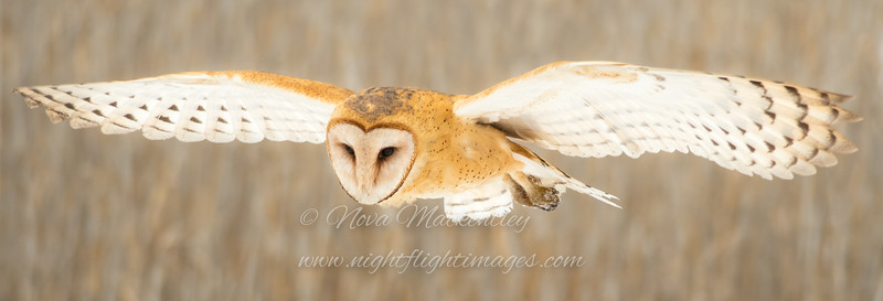 Barn Owl hunting © 2017 Nova Mackentley<br /> Northern UT<br /> BNL