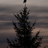 "Northern Hawk-Owl top of tree dusk © 2013 C. M. Neri NHOWTOP <div class=""ss-paypal-button""><div class=""ss-paypal-add-to-cart-section""><div class=""ss-paypal-product-options""><h4>Mat Sizes</h4><ul><li><a href=""https://www.paypal.com/cgi-bin/webscr?cmd=_cart&amp;business=T77V5VKCW4K2U&amp;lc=US&amp;item_name=Northern%20Hawk-Owl%20top%20of%20tree%20dusk%20%C2%A9%202013%20C.%20M.%20Neri%20NHOWTOP&amp;item_number=http%3A%2F%2Fwww.nightflightimages.com%2FGalleries-1%2FOwls%2Fi-cpRX6Jp&amp;button_subtype=products&amp;no_note=0&amp;cn=Add%20special%20instructions%20to%20the%20seller%3A&amp;no_shipping=2&amp;currency_code=USD&amp;weight_unit=lbs&amp;add=1&amp;bn=PP-ShopCartBF%3Abtn_cart_SM.gif%3ANonHosted&amp;on0=Mat%20Sizes&amp;option_select0=5%20x%207&amp;option_amount0=10.00&amp;option_select1=8%20x%2010&amp;option_amount1=18.00&amp;option_select2=11%20x%2014&amp;option_amount2=28.00&amp;option_select3=card&amp;option_amount3=4.00&amp;option_index=0&amp;charset=utf-8&amp;submit=&amp;os0=5%20x%207"" target=""paypal""><span>5 x 7 $11.00 USD</span><img src=""https://www.paypalobjects.com/en_US/i/btn/btn_cart_SM.gif""></a></li><li><a href=""https://www.paypal.com/cgi-bin/webscr?cmd=_cart&amp;business=T77V5VKCW4K2U&amp;lc=US&amp;item_name=Northern%20Hawk-Owl%20top%20of%20tree%20dusk%20%C2%A9%202013%20C.%20M.%20Neri%20NHOWTOP&amp;item_number=http%3A%2F%2Fwww.nightflightimages.com%2FGalleries-1%2FOwls%2Fi-cpRX6Jp&amp;button_subtype=products&amp;no_note=0&amp;cn=Add%20special%20instructions%20to%20the%20seller%3A&amp;no_shipping=2&amp;currency_code=USD&amp;weight_unit=lbs&amp;add=1&amp;bn=PP-ShopCartBF%3Abtn_cart_SM.gif%3ANonHosted&amp;on0=Mat%20Sizes&amp;option_select0=5%20x%207&amp;option_amount0=10.00&amp;option_select1=8%20x%2010&amp;option_amount1=18.00&amp;option_select2=11%20x%2014&amp;option_amount2=28.00&amp;option_select3=card&amp;option_amount3=4.00&amp;option_index=0&amp;charset=utf-8&amp;submit=&amp;os0=8%20x%2010"" target=""paypal""><span>8 x 10 $19.00 USD</span><img src=""https://www.paypalobjects.com/en_US/i/btn/btn_cart_SM.gif""></a></li><li><a href=""https://www.paypal.com/cgi-bin/webscr?cmd=_cart&amp;business=T77V5VKCW4K2U&amp;lc=US&amp;item_name=Northern%20Hawk-Owl%20top%20of%20tree%20dusk%20%C2%A9%202013%20C.%20M.%20Neri%20NHOWTOP&amp;item_number=http%3A%2F%2Fwww.nightflightimages.com%2FGalleries-1%2FOwls%2Fi-cpRX6Jp&amp;button_subtype=products&amp;no_note=0&amp;cn=Add%20special%20instructions%20to%20the%20seller%3A&amp;no_shipping=2&amp;currency_code=USD&amp;weight_unit=lbs&amp;add=1&amp;bn=PP-ShopCartBF%3Abtn_cart_SM.gif%3ANonHosted&amp;on0=Mat%20Sizes&amp;option_select0=5%20x%207&amp;option_amount0=10.00&amp;option_select1=8%20x%2010&amp;option_amount1=18.00&amp;option_select2=11%20x%2014&amp;option_amount2=28.00&amp;option_select3=card&amp;option_amount3=4.00&amp;option_index=0&amp;charset=utf-8&amp;submit=&amp;os0=11%20x%2014"" target=""paypal""><span>11 x 14 $29.00 USD</span><img src=""https://www.paypalobjects.com/en_US/i/btn/btn_cart_SM.gif""></a></li><li><a href=""https://www.paypal.com/cgi-bin/webscr?cmd=_cart&amp;business=T77V5VKCW4K2U&amp;lc=US&amp;item_name=Northern%20Hawk-Owl%20top%20of%20tree%20dusk%20%C2%A9%202013%20C.%20M.%20Neri%20NHOWTOP&amp;item_number=http%3A%2F%2Fwww.nightflightimages.com%2FGalleries-1%2FOwls%2Fi-cpRX6Jp&amp;button_subtype=products&amp;no_note=0&amp;cn=Add%20special%20instructions%20to%20the%20seller%3A&amp;no_shipping=2&amp;currency_code=USD&amp;weight_unit=lbs&amp;add=1&amp;bn=PP-ShopCartBF%3Abtn_cart_SM.gif%3ANonHosted&amp;on0=Mat%20Sizes&amp;option_select0=5%20x%207&amp;option_amount0=10.00&amp;option_select1=8%20x%2010&amp;option_amount1=18.00&amp;option_select2=11%20x%2014&amp;option_amount2=28.00&amp;option_select3=card&amp;option_amount3=4.00&amp;option_index=0&amp;charset=utf-8&amp;submit=&amp;os0=card"" target=""paypal""><span>card $5.00 USD</span><img src=""https://www.paypalobjects.com/en_US/i/btn/btn_cart_SM.gif""></a></li></ul></div></div> <div class=""ss-paypal-view-cart-section""><a href=""https://www.paypal.com/cgi-bin/webscr?cmd=_cart&amp;business=T77V5VKCW4K2U&amp;display=1&amp;item_name=Northern%20Hawk-Owl%20top%20of%20tree%20dusk%20%C2%A9%202013%20C.%20M.%20Neri%20NHOWTOP&amp;item_number=http%3A%2F%2Fwww.nightflightimages.com%2FGalleries-1%2FOwls%2Fi-cpRX6Jp&amp;charset=utf-8&amp;submit="" target=""paypal"" class=""ss-paypal-submit-button""><img src=""https://www.paypalobjects.com/en_US/i/btn/btn_viewcart_LG.gif""></a></div></div><div class=""ss-paypal-button-end""></div>"