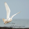 "Snowy Owl © 2017 Chris M Neri Whitefish Point, MI SN17  <div class=""ss-paypal-button""><div class=""ss-paypal-add-to-cart-section""><div class=""ss-paypal-product-options""><h4>Mat Sizes</h4><ul><li><a href=""https://www.paypal.com/cgi-bin/webscr?cmd=_cart&amp;business=T77V5VKCW4K2U&amp;lc=US&amp;item_name=Snowy%20Owl%20%C2%A9%202017%20Chris%20M%20Neri%20Whitefish%20Point%2C%20MI%20SN17&amp;item_number=http%3A%2F%2Fwww.nightflightimages.com%2FGalleries-1%2FNew%2Fi-fTndw8S&amp;button_subtype=products&amp;no_note=0&amp;cn=Add%20special%20instructions%20to%20the%20seller%3A&amp;no_shipping=2&amp;currency_code=USD&amp;weight_unit=lbs&amp;add=1&amp;bn=PP-ShopCartBF%3Abtn_cart_SM.gif%3ANonHosted&amp;on0=Mat%20Sizes&amp;option_select0=5%20x%207&amp;option_amount0=12.00&amp;option_select1=8%20x%2010&amp;option_amount1=19.00&amp;option_select2=11%20x%2014&amp;option_amount2=29.00&amp;option_select3=card&amp;option_amount3=5.00&amp;option_index=0&amp;charset=utf-8&amp;submit=&amp;os0=5%20x%207"" target=""paypal""><span>5 x 7 $12.00 USD</span><img src=""https://www.paypalobjects.com/en_US/i/btn/btn_cart_SM.gif""></a></li><li><a href=""https://www.paypal.com/cgi-bin/webscr?cmd=_cart&amp;business=T77V5VKCW4K2U&amp;lc=US&amp;item_name=Snowy%20Owl%20%C2%A9%202017%20Chris%20M%20Neri%20Whitefish%20Point%2C%20MI%20SN17&amp;item_number=http%3A%2F%2Fwww.nightflightimages.com%2FGalleries-1%2FNew%2Fi-fTndw8S&amp;button_subtype=products&amp;no_note=0&amp;cn=Add%20special%20instructions%20to%20the%20seller%3A&amp;no_shipping=2&amp;currency_code=USD&amp;weight_unit=lbs&amp;add=1&amp;bn=PP-ShopCartBF%3Abtn_cart_SM.gif%3ANonHosted&amp;on0=Mat%20Sizes&amp;option_select0=5%20x%207&amp;option_amount0=12.00&amp;option_select1=8%20x%2010&amp;option_amount1=19.00&amp;option_select2=11%20x%2014&amp;option_amount2=29.00&amp;option_select3=card&amp;option_amount3=5.00&amp;option_index=0&amp;charset=utf-8&amp;submit=&amp;os0=8%20x%2010"" target=""paypal""><span>8 x 10 $19.00 USD</span><img src=""https://www.paypalobjects.com/en_US/i/btn/btn_cart_SM.gif""></a></li><li><a href=""https://www.paypal.com/cgi-bin/webscr?cmd=_cart&amp;business=T77V5VKCW4K2U&amp;lc=US&amp;item_name=Snowy%20Owl%20%C2%A9%202017%20Chris%20M%20Neri%20Whitefish%20Point%2C%20MI%20SN17&amp;item_number=http%3A%2F%2Fwww.nightflightimages.com%2FGalleries-1%2FNew%2Fi-fTndw8S&amp;button_subtype=products&amp;no_note=0&amp;cn=Add%20special%20instructions%20to%20the%20seller%3A&amp;no_shipping=2&amp;currency_code=USD&amp;weight_unit=lbs&amp;add=1&amp;bn=PP-ShopCartBF%3Abtn_cart_SM.gif%3ANonHosted&amp;on0=Mat%20Sizes&amp;option_select0=5%20x%207&amp;option_amount0=12.00&amp;option_select1=8%20x%2010&amp;option_amount1=19.00&amp;option_select2=11%20x%2014&amp;option_amount2=29.00&amp;option_select3=card&amp;option_amount3=5.00&amp;option_index=0&amp;charset=utf-8&amp;submit=&amp;os0=11%20x%2014"" target=""paypal""><span>11 x 14 $29.00 USD</span><img src=""https://www.paypalobjects.com/en_US/i/btn/btn_cart_SM.gif""></a></li><li><a href=""https://www.paypal.com/cgi-bin/webscr?cmd=_cart&amp;business=T77V5VKCW4K2U&amp;lc=US&amp;item_name=Snowy%20Owl%20%C2%A9%202017%20Chris%20M%20Neri%20Whitefish%20Point%2C%20MI%20SN17&amp;item_number=http%3A%2F%2Fwww.nightflightimages.com%2FGalleries-1%2FNew%2Fi-fTndw8S&amp;button_subtype=products&amp;no_note=0&amp;cn=Add%20special%20instructions%20to%20the%20seller%3A&amp;no_shipping=2&amp;currency_code=USD&amp;weight_unit=lbs&amp;add=1&amp;bn=PP-ShopCartBF%3Abtn_cart_SM.gif%3ANonHosted&amp;on0=Mat%20Sizes&amp;option_select0=5%20x%207&amp;option_amount0=12.00&amp;option_select1=8%20x%2010&amp;option_amount1=19.00&amp;option_select2=11%20x%2014&amp;option_amount2=29.00&amp;option_select3=card&amp;option_amount3=5.00&amp;option_index=0&amp;charset=utf-8&amp;submit=&amp;os0=card"" target=""paypal""><span>card $5.00 USD</span><img src=""https://www.paypalobjects.com/en_US/i/btn/btn_cart_SM.gif""></a></li></ul></div></div> <div class=""ss-paypal-view-cart-section""><a href=""https://www.paypal.com/cgi-bin/webscr?cmd=_cart&amp;business=T77V5VKCW4K2U&amp;display=1&amp;item_name=Snowy%20Owl%20%C2%A9%202017%20Chris%20M%20Neri%20Whitefish%20Point%2C%20MI%20SN17&amp;item_number=http%3A%2F%2Fwww.nightflightimages.com%2FGalleries-1%2FNew%2Fi-fTndw8S&amp;charset=utf-8&amp;submit="" target=""paypal"" class=""ss-paypal-submit-button""><img src=""https://www.paypalobjects.com/en_US/i/btn/btn_viewcart_LG.gif""></a></div></div><div class=""ss-paypal-button-end""></div>"