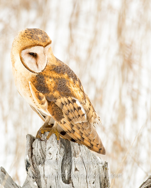 "Barn Owl portrait © 2017 Nova Mackentley Northern UT BNP  <div class=""ss-paypal-button""><div class=""ss-paypal-add-to-cart-section""><div class=""ss-paypal-product-options""><h4>Mat Sizes</h4><ul><li><a href=""https://www.paypal.com/cgi-bin/webscr?cmd=_cart&amp;business=T77V5VKCW4K2U&amp;lc=US&amp;item_name=Barn%20Owl%20portrait%20%C2%A9%202017%20Nova%20Mackentley%20Northern%20UT%20BNP&amp;item_number=http%3A%2F%2Fwww.nightflightimages.com%2FGalleries-1%2FNew%2Fi-h3bhDNK&amp;button_subtype=products&amp;no_note=0&amp;cn=Add%20special%20instructions%20to%20the%20seller%3A&amp;no_shipping=2&amp;currency_code=USD&amp;weight_unit=lbs&amp;add=1&amp;bn=PP-ShopCartBF%3Abtn_cart_SM.gif%3ANonHosted&amp;on0=Mat%20Sizes&amp;option_select0=5%20x%207&amp;option_amount0=10.00&amp;option_select1=8%20x%2010&amp;option_amount1=18.00&amp;option_select2=11%20x%2014&amp;option_amount2=28.00&amp;option_select3=card&amp;option_amount3=4.00&amp;option_index=0&amp;charset=utf-8&amp;submit=&amp;os0=5%20x%207"" target=""paypal""><span>5 x 7 $11.00 USD</span><img src=""https://www.paypalobjects.com/en_US/i/btn/btn_cart_SM.gif""></a></li><li><a href=""https://www.paypal.com/cgi-bin/webscr?cmd=_cart&amp;business=T77V5VKCW4K2U&amp;lc=US&amp;item_name=Barn%20Owl%20portrait%20%C2%A9%202017%20Nova%20Mackentley%20Northern%20UT%20BNP&amp;item_number=http%3A%2F%2Fwww.nightflightimages.com%2FGalleries-1%2FNew%2Fi-h3bhDNK&amp;button_subtype=products&amp;no_note=0&amp;cn=Add%20special%20instructions%20to%20the%20seller%3A&amp;no_shipping=2&amp;currency_code=USD&amp;weight_unit=lbs&amp;add=1&amp;bn=PP-ShopCartBF%3Abtn_cart_SM.gif%3ANonHosted&amp;on0=Mat%20Sizes&amp;option_select0=5%20x%207&amp;option_amount0=10.00&amp;option_select1=8%20x%2010&amp;option_amount1=18.00&amp;option_select2=11%20x%2014&amp;option_amount2=28.00&amp;option_select3=card&amp;option_amount3=4.00&amp;option_index=0&amp;charset=utf-8&amp;submit=&amp;os0=8%20x%2010"" target=""paypal""><span>8 x 10 $19.00 USD</span><img src=""https://www.paypalobjects.com/en_US/i/btn/btn_cart_SM.gif""></a></li><li><a href=""https://www.paypal.com/cgi-bin/webscr?cmd=_cart&amp;business=T77V5VKCW4K2U&amp;lc=US&amp;item_name=Barn%20Owl%20portrait%20%C2%A9%202017%20Nova%20Mackentley%20Northern%20UT%20BNP&amp;item_number=http%3A%2F%2Fwww.nightflightimages.com%2FGalleries-1%2FNew%2Fi-h3bhDNK&amp;button_subtype=products&amp;no_note=0&amp;cn=Add%20special%20instructions%20to%20the%20seller%3A&amp;no_shipping=2&amp;currency_code=USD&amp;weight_unit=lbs&amp;add=1&amp;bn=PP-ShopCartBF%3Abtn_cart_SM.gif%3ANonHosted&amp;on0=Mat%20Sizes&amp;option_select0=5%20x%207&amp;option_amount0=10.00&amp;option_select1=8%20x%2010&amp;option_amount1=18.00&amp;option_select2=11%20x%2014&amp;option_amount2=28.00&amp;option_select3=card&amp;option_amount3=4.00&amp;option_index=0&amp;charset=utf-8&amp;submit=&amp;os0=11%20x%2014"" target=""paypal""><span>11 x 14 $29.00 USD</span><img src=""https://www.paypalobjects.com/en_US/i/btn/btn_cart_SM.gif""></a></li><li><a href=""https://www.paypal.com/cgi-bin/webscr?cmd=_cart&amp;business=T77V5VKCW4K2U&amp;lc=US&amp;item_name=Barn%20Owl%20portrait%20%C2%A9%202017%20Nova%20Mackentley%20Northern%20UT%20BNP&amp;item_number=http%3A%2F%2Fwww.nightflightimages.com%2FGalleries-1%2FNew%2Fi-h3bhDNK&amp;button_subtype=products&amp;no_note=0&amp;cn=Add%20special%20instructions%20to%20the%20seller%3A&amp;no_shipping=2&amp;currency_code=USD&amp;weight_unit=lbs&amp;add=1&amp;bn=PP-ShopCartBF%3Abtn_cart_SM.gif%3ANonHosted&amp;on0=Mat%20Sizes&amp;option_select0=5%20x%207&amp;option_amount0=10.00&amp;option_select1=8%20x%2010&amp;option_amount1=18.00&amp;option_select2=11%20x%2014&amp;option_amount2=28.00&amp;option_select3=card&amp;option_amount3=4.00&amp;option_index=0&amp;charset=utf-8&amp;submit=&amp;os0=card"" target=""paypal""><span>card $5.00 USD</span><img src=""https://www.paypalobjects.com/en_US/i/btn/btn_cart_SM.gif""></a></li></ul></div></div> <div class=""ss-paypal-view-cart-section""><a href=""https://www.paypal.com/cgi-bin/webscr?cmd=_cart&amp;business=T77V5VKCW4K2U&amp;display=1&amp;item_name=Barn%20Owl%20portrait%20%C2%A9%202017%20Nova%20Mackentley%20Northern%20UT%20BNP&amp;item_number=http%3A%2F%2Fwww.nightflightimages.com%2FGalleries-1%2FNew%2Fi-h3bhDNK&amp;charset=utf-8&amp;submit="" target=""paypal"" class=""ss-paypal-submit-button""><img src=""https://www.paypalobjects.com/en_US/i/btn/btn_viewcart_LG.gif""></a></div></div><div class=""ss-paypal-button-end""></div>"