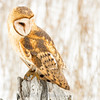 "Barn Owl portrait © 2017 Nova Mackentley Northern UT BNP  <div class=""ss-paypal-button""><div class=""ss-paypal-add-to-cart-section""><div class=""ss-paypal-product-options""><h4>Mat Sizes</h4><ul><li><a href=""https://www.paypal.com/cgi-bin/webscr?cmd=_cart&business=T77V5VKCW4K2U&lc=US&item_name=Barn%20Owl%20portrait%20%C2%A9%202017%20Nova%20Mackentley%20Northern%20UT%20BNP&item_number=http%3A%2F%2Fwww.nightflightimages.com%2FGalleries-1%2FNew%2Fi-h3bhDNK&button_subtype=products&no_note=0&cn=Add%20special%20instructions%20to%20the%20seller%3A&no_shipping=2&currency_code=USD&weight_unit=lbs&add=1&bn=PP-ShopCartBF%3Abtn_cart_SM.gif%3ANonHosted&on0=Mat%20Sizes&option_select0=5%20x%207&option_amount0=10.00&option_select1=8%20x%2010&option_amount1=18.00&option_select2=11%20x%2014&option_amount2=28.00&option_select3=card&option_amount3=4.00&option_index=0&charset=utf-8&submit=&os0=5%20x%207"" target=""paypal""><span>5 x 7 $11.00 USD</span><img src=""https://www.paypalobjects.com/en_US/i/btn/btn_cart_SM.gif""></a></li><li><a href=""https://www.paypal.com/cgi-bin/webscr?cmd=_cart&business=T77V5VKCW4K2U&lc=US&item_name=Barn%20Owl%20portrait%20%C2%A9%202017%20Nova%20Mackentley%20Northern%20UT%20BNP&item_number=http%3A%2F%2Fwww.nightflightimages.com%2FGalleries-1%2FNew%2Fi-h3bhDNK&button_subtype=products&no_note=0&cn=Add%20special%20instructions%20to%20the%20seller%3A&no_shipping=2&currency_code=USD&weight_unit=lbs&add=1&bn=PP-ShopCartBF%3Abtn_cart_SM.gif%3ANonHosted&on0=Mat%20Sizes&option_select0=5%20x%207&option_amount0=10.00&option_select1=8%20x%2010&option_amount1=18.00&option_select2=11%20x%2014&option_amount2=28.00&option_select3=card&option_amount3=4.00&option_index=0&charset=utf-8&submit=&os0=8%20x%2010"" target=""paypal""><span>8 x 10 $19.00 USD</span><img src=""https://www.paypalobjects.com/en_US/i/btn/btn_cart_SM.gif""></a></li><li><a href=""https://www.paypal.com/cgi-bin/webscr?cmd=_cart&business=T77V5VKCW4K2U&lc=US&item_name=Barn%20Owl%20portrait%20%C2%A9%202017%20Nova%20Mackentley%20Northern%20UT%20BNP&item_number=http%3A%2F%2Fwww.nightflightimages.com%2FGalleries-1%2FNew%2Fi-h3bhDNK&button_subtype=products&no_note=0&cn=Add%20special%20instructions%20to%20the%20seller%3A&no_shipping=2&currency_code=USD&weight_unit=lbs&add=1&bn=PP-ShopCartBF%3Abtn_cart_SM.gif%3ANonHosted&on0=Mat%20Sizes&option_select0=5%20x%207&option_amount0=10.00&option_select1=8%20x%2010&option_amount1=18.00&option_select2=11%20x%2014&option_amount2=28.00&option_select3=card&option_amount3=4.00&option_index=0&charset=utf-8&submit=&os0=11%20x%2014"" target=""paypal""><span>11 x 14 $29.00 USD</span><img src=""https://www.paypalobjects.com/en_US/i/btn/btn_cart_SM.gif""></a></li><li><a href=""https://www.paypal.com/cgi-bin/webscr?cmd=_cart&business=T77V5VKCW4K2U&lc=US&item_name=Barn%20Owl%20portrait%20%C2%A9%202017%20Nova%20Mackentley%20Northern%20UT%20BNP&item_number=http%3A%2F%2Fwww.nightflightimages.com%2FGalleries-1%2FNew%2Fi-h3bhDNK&button_subtype=products&no_note=0&cn=Add%20special%20instructions%20to%20the%20seller%3A&no_shipping=2&currency_code=USD&weight_unit=lbs&add=1&bn=PP-ShopCartBF%3Abtn_cart_SM.gif%3ANonHosted&on0=Mat%20Sizes&option_select0=5%20x%207&option_amount0=10.00&option_select1=8%20x%2010&option_amount1=18.00&option_select2=11%20x%2014&option_amount2=28.00&option_select3=card&option_amount3=4.00&option_index=0&charset=utf-8&submit=&os0=card"" target=""paypal""><span>card $5.00 USD</span><img src=""https://www.paypalobjects.com/en_US/i/btn/btn_cart_SM.gif""></a></li></ul></div></div> <div class=""ss-paypal-view-cart-section""><a href=""https://www.paypal.com/cgi-bin/webscr?cmd=_cart&business=T77V5VKCW4K2U&display=1&item_name=Barn%20Owl%20portrait%20%C2%A9%202017%20Nova%20Mackentley%20Northern%20UT%20BNP&item_number=http%3A%2F%2Fwww.nightflightimages.com%2FGalleries-1%2FNew%2Fi-h3bhDNK&charset=utf-8&submit="" target=""paypal"" class=""ss-paypal-submit-button""><img src=""https://www.paypalobjects.com/en_US/i/btn/btn_viewcart_LG.gif""></a></div></div><div class=""ss-paypal-button-end""></div>"